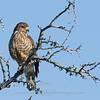 "Roadside Hawk © 2010 C. M. Neri.  Falcon Dam, TX ROHA  <div class=""ss-paypal-button""><div class=""ss-paypal-add-to-cart-section""><div class=""ss-paypal-product-options""><h4>Mat Sizes</h4><ul><li><a href=""https://www.paypal.com/cgi-bin/webscr?cmd=_cart&business=T77V5VKCW4K2U&lc=US&item_name=Roadside%20Hawk%20%C2%A9%202010%20C.%20M.%20Neri.%20%20Falcon%20Dam%2C%20TX%20ROHA&item_number=http%3A%2F%2Fwww.nightflightimages.com%2FGalleries-1%2FHawks%2Fi-zhQb8SN&button_subtype=products&no_note=0&cn=Add%20special%20instructions%20to%20the%20seller%3A&no_shipping=2&currency_code=USD&weight_unit=lbs&add=1&bn=PP-ShopCartBF%3Abtn_cart_SM.gif%3ANonHosted&on0=Mat%20Sizes&option_select0=5%20x%207&option_amount0=10.00&option_select1=8%20x%2010&option_amount1=18.00&option_select2=11%20x%2014&option_amount2=28.00&option_select3=card&option_amount3=4.00&option_index=0&charset=utf-8&submit=&os0=5%20x%207"" target=""paypal""><span>5 x 7 $11.00 USD</span><img src=""https://www.paypalobjects.com/en_US/i/btn/btn_cart_SM.gif""></a></li><li><a href=""https://www.paypal.com/cgi-bin/webscr?cmd=_cart&business=T77V5VKCW4K2U&lc=US&item_name=Roadside%20Hawk%20%C2%A9%202010%20C.%20M.%20Neri.%20%20Falcon%20Dam%2C%20TX%20ROHA&item_number=http%3A%2F%2Fwww.nightflightimages.com%2FGalleries-1%2FHawks%2Fi-zhQb8SN&button_subtype=products&no_note=0&cn=Add%20special%20instructions%20to%20the%20seller%3A&no_shipping=2&currency_code=USD&weight_unit=lbs&add=1&bn=PP-ShopCartBF%3Abtn_cart_SM.gif%3ANonHosted&on0=Mat%20Sizes&option_select0=5%20x%207&option_amount0=10.00&option_select1=8%20x%2010&option_amount1=18.00&option_select2=11%20x%2014&option_amount2=28.00&option_select3=card&option_amount3=4.00&option_index=0&charset=utf-8&submit=&os0=8%20x%2010"" target=""paypal""><span>8 x 10 $19.00 USD</span><img src=""https://www.paypalobjects.com/en_US/i/btn/btn_cart_SM.gif""></a></li><li><a href=""https://www.paypal.com/cgi-bin/webscr?cmd=_cart&business=T77V5VKCW4K2U&lc=US&item_name=Roadside%20Hawk%20%C2%A9%202010%20C.%20M.%20Neri.%20%20Falcon%20Dam%2C%20TX%20ROHA&item_number=http%3A%2F%2Fwww.nightflightimages.com%2FGalleries-1%2FHawks%2Fi-zhQb8SN&button_subtype=products&no_note=0&cn=Add%20special%20instructions%20to%20the%20seller%3A&no_shipping=2&currency_code=USD&weight_unit=lbs&add=1&bn=PP-ShopCartBF%3Abtn_cart_SM.gif%3ANonHosted&on0=Mat%20Sizes&option_select0=5%20x%207&option_amount0=10.00&option_select1=8%20x%2010&option_amount1=18.00&option_select2=11%20x%2014&option_amount2=28.00&option_select3=card&option_amount3=4.00&option_index=0&charset=utf-8&submit=&os0=11%20x%2014"" target=""paypal""><span>11 x 14 $29.00 USD</span><img src=""https://www.paypalobjects.com/en_US/i/btn/btn_cart_SM.gif""></a></li><li><a href=""https://www.paypal.com/cgi-bin/webscr?cmd=_cart&business=T77V5VKCW4K2U&lc=US&item_name=Roadside%20Hawk%20%C2%A9%202010%20C.%20M.%20Neri.%20%20Falcon%20Dam%2C%20TX%20ROHA&item_number=http%3A%2F%2Fwww.nightflightimages.com%2FGalleries-1%2FHawks%2Fi-zhQb8SN&button_subtype=products&no_note=0&cn=Add%20special%20instructions%20to%20the%20seller%3A&no_shipping=2&currency_code=USD&weight_unit=lbs&add=1&bn=PP-ShopCartBF%3Abtn_cart_SM.gif%3ANonHosted&on0=Mat%20Sizes&option_select0=5%20x%207&option_amount0=10.00&option_select1=8%20x%2010&option_amount1=18.00&option_select2=11%20x%2014&option_amount2=28.00&option_select3=card&option_amount3=4.00&option_index=0&charset=utf-8&submit=&os0=card"" target=""paypal""><span>card $5.00 USD</span><img src=""https://www.paypalobjects.com/en_US/i/btn/btn_cart_SM.gif""></a></li></ul></div></div> <div class=""ss-paypal-view-cart-section""><a href=""https://www.paypal.com/cgi-bin/webscr?cmd=_cart&business=T77V5VKCW4K2U&display=1&item_name=Roadside%20Hawk%20%C2%A9%202010%20C.%20M.%20Neri.%20%20Falcon%20Dam%2C%20TX%20ROHA&item_number=http%3A%2F%2Fwww.nightflightimages.com%2FGalleries-1%2FHawks%2Fi-zhQb8SN&charset=utf-8&submit="" target=""paypal"" class=""ss-paypal-submit-button""><img src=""https://www.paypalobjects.com/en_US/i/btn/btn_viewcart_LG.gif""></a></div></div><div class=""ss-paypal-button-end""></div>"