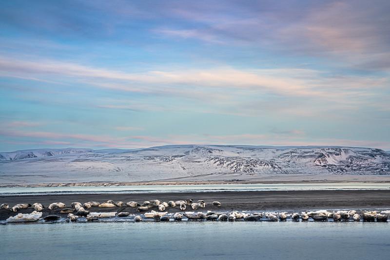 Seals North Coast, Iceland