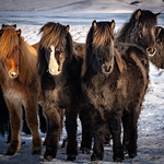 Icelandic Horses Winter