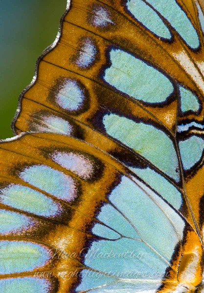 "Malachite Butterfly Wing © 2008 Nova Mackentley Santa Ana NWR, TX MBW  <div class=""ss-paypal-button""><div class=""ss-paypal-add-to-cart-section""><div class=""ss-paypal-product-options""><h4>Mat Sizes</h4><ul><li><a href=""https://www.paypal.com/cgi-bin/webscr?cmd=_cart&amp;business=T77V5VKCW4K2U&amp;lc=US&amp;item_name=Malachite%20Butterfly%20Wing%20%C2%A9%202008%20Nova%20Mackentley%20Santa%20Ana%20NWR%2C%20TX%20MBW&amp;item_number=http%3A%2F%2Fwww.nightflightimages.com%2FGalleries-1%2FImpressions%2Fi-4PNrNPd&amp;button_subtype=products&amp;no_note=0&amp;cn=Add%20special%20instructions%20to%20the%20seller%3A&amp;no_shipping=2&amp;currency_code=USD&amp;weight_unit=lbs&amp;add=1&amp;bn=PP-ShopCartBF%3Abtn_cart_SM.gif%3ANonHosted&amp;on0=Mat%20Sizes&amp;option_select0=5%20x%207&amp;option_amount0=10.00&amp;option_select1=8%20x%2010&amp;option_amount1=18.00&amp;option_select2=11%20x%2014&amp;option_amount2=28.00&amp;option_select3=card&amp;option_amount3=4.00&amp;option_index=0&amp;charset=utf-8&amp;submit=&amp;os0=5%20x%207"" target=""paypal""><span>5 x 7 $11.00 USD</span><img src=""https://www.paypalobjects.com/en_US/i/btn/btn_cart_SM.gif""></a></li><li><a href=""https://www.paypal.com/cgi-bin/webscr?cmd=_cart&amp;business=T77V5VKCW4K2U&amp;lc=US&amp;item_name=Malachite%20Butterfly%20Wing%20%C2%A9%202008%20Nova%20Mackentley%20Santa%20Ana%20NWR%2C%20TX%20MBW&amp;item_number=http%3A%2F%2Fwww.nightflightimages.com%2FGalleries-1%2FImpressions%2Fi-4PNrNPd&amp;button_subtype=products&amp;no_note=0&amp;cn=Add%20special%20instructions%20to%20the%20seller%3A&amp;no_shipping=2&amp;currency_code=USD&amp;weight_unit=lbs&amp;add=1&amp;bn=PP-ShopCartBF%3Abtn_cart_SM.gif%3ANonHosted&amp;on0=Mat%20Sizes&amp;option_select0=5%20x%207&amp;option_amount0=10.00&amp;option_select1=8%20x%2010&amp;option_amount1=18.00&amp;option_select2=11%20x%2014&amp;option_amount2=28.00&amp;option_select3=card&amp;option_amount3=4.00&amp;option_index=0&amp;charset=utf-8&amp;submit=&amp;os0=8%20x%2010"" target=""paypal""><span>8 x 10 $19.00 USD</span><img src=""https://www.paypalobjects.com/en_US/i/btn/btn_cart_SM.gif""></a></li><li><a href=""https://www.paypal.com/cgi-bin/webscr?cmd=_cart&amp;business=T77V5VKCW4K2U&amp;lc=US&amp;item_name=Malachite%20Butterfly%20Wing%20%C2%A9%202008%20Nova%20Mackentley%20Santa%20Ana%20NWR%2C%20TX%20MBW&amp;item_number=http%3A%2F%2Fwww.nightflightimages.com%2FGalleries-1%2FImpressions%2Fi-4PNrNPd&amp;button_subtype=products&amp;no_note=0&amp;cn=Add%20special%20instructions%20to%20the%20seller%3A&amp;no_shipping=2&amp;currency_code=USD&amp;weight_unit=lbs&amp;add=1&amp;bn=PP-ShopCartBF%3Abtn_cart_SM.gif%3ANonHosted&amp;on0=Mat%20Sizes&amp;option_select0=5%20x%207&amp;option_amount0=10.00&amp;option_select1=8%20x%2010&amp;option_amount1=18.00&amp;option_select2=11%20x%2014&amp;option_amount2=28.00&amp;option_select3=card&amp;option_amount3=4.00&amp;option_index=0&amp;charset=utf-8&amp;submit=&amp;os0=11%20x%2014"" target=""paypal""><span>11 x 14 $29.00 USD</span><img src=""https://www.paypalobjects.com/en_US/i/btn/btn_cart_SM.gif""></a></li><li><a href=""https://www.paypal.com/cgi-bin/webscr?cmd=_cart&amp;business=T77V5VKCW4K2U&amp;lc=US&amp;item_name=Malachite%20Butterfly%20Wing%20%C2%A9%202008%20Nova%20Mackentley%20Santa%20Ana%20NWR%2C%20TX%20MBW&amp;item_number=http%3A%2F%2Fwww.nightflightimages.com%2FGalleries-1%2FImpressions%2Fi-4PNrNPd&amp;button_subtype=products&amp;no_note=0&amp;cn=Add%20special%20instructions%20to%20the%20seller%3A&amp;no_shipping=2&amp;currency_code=USD&amp;weight_unit=lbs&amp;add=1&amp;bn=PP-ShopCartBF%3Abtn_cart_SM.gif%3ANonHosted&amp;on0=Mat%20Sizes&amp;option_select0=5%20x%207&amp;option_amount0=10.00&amp;option_select1=8%20x%2010&amp;option_amount1=18.00&amp;option_select2=11%20x%2014&amp;option_amount2=28.00&amp;option_select3=card&amp;option_amount3=4.00&amp;option_index=0&amp;charset=utf-8&amp;submit=&amp;os0=card"" target=""paypal""><span>card $5.00 USD</span><img src=""https://www.paypalobjects.com/en_US/i/btn/btn_cart_SM.gif""></a></li></ul></div></div> <div class=""ss-paypal-view-cart-section""><a href=""https://www.paypal.com/cgi-bin/webscr?cmd=_cart&amp;business=T77V5VKCW4K2U&amp;display=1&amp;item_name=Malachite%20Butterfly%20Wing%20%C2%A9%202008%20Nova%20Mackentley%20Santa%20Ana%20NWR%2C%20TX%20MBW&amp;item_number=http%3A%2F%2Fwww.nightflightimages.com%2FGalleries-1%2FImpressions%2Fi-4PNrNPd&amp;charset=utf-8&amp;submit="" target=""paypal"" class=""ss-paypal-submit-button""><img src=""https://www.paypalobjects.com/en_US/i/btn/btn_viewcart_LG.gif""></a></div></div><div class=""ss-paypal-button-end""></div>"