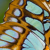 "Malachite Butterfly Wing © 2008 Nova Mackentley Santa Ana NWR, TX MBW  <div class=""ss-paypal-button""><div class=""ss-paypal-add-to-cart-section""><div class=""ss-paypal-product-options""><h4>Mat Sizes</h4><ul><li><a href=""https://www.paypal.com/cgi-bin/webscr?cmd=_cart&business=T77V5VKCW4K2U&lc=US&item_name=Malachite%20Butterfly%20Wing%20%C2%A9%202008%20Nova%20Mackentley%20Santa%20Ana%20NWR%2C%20TX%20MBW&item_number=http%3A%2F%2Fwww.nightflightimages.com%2FGalleries-1%2FImpressions%2Fi-4PNrNPd&button_subtype=products&no_note=0&cn=Add%20special%20instructions%20to%20the%20seller%3A&no_shipping=2&currency_code=USD&weight_unit=lbs&add=1&bn=PP-ShopCartBF%3Abtn_cart_SM.gif%3ANonHosted&on0=Mat%20Sizes&option_select0=5%20x%207&option_amount0=10.00&option_select1=8%20x%2010&option_amount1=18.00&option_select2=11%20x%2014&option_amount2=28.00&option_select3=card&option_amount3=4.00&option_index=0&charset=utf-8&submit=&os0=5%20x%207"" target=""paypal""><span>5 x 7 $11.00 USD</span><img src=""https://www.paypalobjects.com/en_US/i/btn/btn_cart_SM.gif""></a></li><li><a href=""https://www.paypal.com/cgi-bin/webscr?cmd=_cart&business=T77V5VKCW4K2U&lc=US&item_name=Malachite%20Butterfly%20Wing%20%C2%A9%202008%20Nova%20Mackentley%20Santa%20Ana%20NWR%2C%20TX%20MBW&item_number=http%3A%2F%2Fwww.nightflightimages.com%2FGalleries-1%2FImpressions%2Fi-4PNrNPd&button_subtype=products&no_note=0&cn=Add%20special%20instructions%20to%20the%20seller%3A&no_shipping=2&currency_code=USD&weight_unit=lbs&add=1&bn=PP-ShopCartBF%3Abtn_cart_SM.gif%3ANonHosted&on0=Mat%20Sizes&option_select0=5%20x%207&option_amount0=10.00&option_select1=8%20x%2010&option_amount1=18.00&option_select2=11%20x%2014&option_amount2=28.00&option_select3=card&option_amount3=4.00&option_index=0&charset=utf-8&submit=&os0=8%20x%2010"" target=""paypal""><span>8 x 10 $19.00 USD</span><img src=""https://www.paypalobjects.com/en_US/i/btn/btn_cart_SM.gif""></a></li><li><a href=""https://www.paypal.com/cgi-bin/webscr?cmd=_cart&business=T77V5VKCW4K2U&lc=US&item_name=Malachite%20Butterfly%20Wing%20%C2%A9%202008%20Nova%20Mackentley%20Santa%20Ana%20NWR%2C%20TX%20MBW&item_number=http%3A%2F%2Fwww.nightflightimages.com%2FGalleries-1%2FImpressions%2Fi-4PNrNPd&button_subtype=products&no_note=0&cn=Add%20special%20instructions%20to%20the%20seller%3A&no_shipping=2&currency_code=USD&weight_unit=lbs&add=1&bn=PP-ShopCartBF%3Abtn_cart_SM.gif%3ANonHosted&on0=Mat%20Sizes&option_select0=5%20x%207&option_amount0=10.00&option_select1=8%20x%2010&option_amount1=18.00&option_select2=11%20x%2014&option_amount2=28.00&option_select3=card&option_amount3=4.00&option_index=0&charset=utf-8&submit=&os0=11%20x%2014"" target=""paypal""><span>11 x 14 $29.00 USD</span><img src=""https://www.paypalobjects.com/en_US/i/btn/btn_cart_SM.gif""></a></li><li><a href=""https://www.paypal.com/cgi-bin/webscr?cmd=_cart&business=T77V5VKCW4K2U&lc=US&item_name=Malachite%20Butterfly%20Wing%20%C2%A9%202008%20Nova%20Mackentley%20Santa%20Ana%20NWR%2C%20TX%20MBW&item_number=http%3A%2F%2Fwww.nightflightimages.com%2FGalleries-1%2FImpressions%2Fi-4PNrNPd&button_subtype=products&no_note=0&cn=Add%20special%20instructions%20to%20the%20seller%3A&no_shipping=2&currency_code=USD&weight_unit=lbs&add=1&bn=PP-ShopCartBF%3Abtn_cart_SM.gif%3ANonHosted&on0=Mat%20Sizes&option_select0=5%20x%207&option_amount0=10.00&option_select1=8%20x%2010&option_amount1=18.00&option_select2=11%20x%2014&option_amount2=28.00&option_select3=card&option_amount3=4.00&option_index=0&charset=utf-8&submit=&os0=card"" target=""paypal""><span>card $5.00 USD</span><img src=""https://www.paypalobjects.com/en_US/i/btn/btn_cart_SM.gif""></a></li></ul></div></div> <div class=""ss-paypal-view-cart-section""><a href=""https://www.paypal.com/cgi-bin/webscr?cmd=_cart&business=T77V5VKCW4K2U&display=1&item_name=Malachite%20Butterfly%20Wing%20%C2%A9%202008%20Nova%20Mackentley%20Santa%20Ana%20NWR%2C%20TX%20MBW&item_number=http%3A%2F%2Fwww.nightflightimages.com%2FGalleries-1%2FImpressions%2Fi-4PNrNPd&charset=utf-8&submit="" target=""paypal"" class=""ss-paypal-submit-button""><img src=""https://www.paypalobjects.com/en_US/i/btn/btn_viewcart_LG.gif""></a></div></div><div class=""ss-paypal-button-end""></div>"