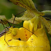 "Crab Spider with a cranefly on a Yellow Ladyslipper  © 2006 C. M. Neri The Headlands, MI CRABSP  <div class=""ss-paypal-button""><div class=""ss-paypal-add-to-cart-section""><div class=""ss-paypal-product-options""><h4>Mat Sizes</h4><ul><li><a href=""https://www.paypal.com/cgi-bin/webscr?cmd=_cart&business=T77V5VKCW4K2U&lc=US&item_name=Crab%20Spider%20with%20a%20cranefly%20on%20a%20Yellow%20Ladyslipper%20%20%C2%A9%202006%20C.%20M.%20Neri%20The%20Headlands%2C%20MI%20CRABSP&item_number=http%3A%2F%2Fwww.nightflightimages.com%2FGalleries-1%2FImpressions%2Fi-Rk2WZZC&button_subtype=products&no_note=0&cn=Add%20special%20instructions%20to%20the%20seller%3A&no_shipping=2&currency_code=USD&weight_unit=lbs&add=1&bn=PP-ShopCartBF%3Abtn_cart_SM.gif%3ANonHosted&on0=Mat%20Sizes&option_select0=5%20x%207&option_amount0=10.00&option_select1=8%20x%2010&option_amount1=18.00&option_select2=11%20x%2014&option_amount2=28.00&option_select3=card&option_amount3=4.00&option_index=0&charset=utf-8&submit=&os0=5%20x%207"" target=""paypal""><span>5 x 7 $11.00 USD</span><img src=""https://www.paypalobjects.com/en_US/i/btn/btn_cart_SM.gif""></a></li><li><a href=""https://www.paypal.com/cgi-bin/webscr?cmd=_cart&business=T77V5VKCW4K2U&lc=US&item_name=Crab%20Spider%20with%20a%20cranefly%20on%20a%20Yellow%20Ladyslipper%20%20%C2%A9%202006%20C.%20M.%20Neri%20The%20Headlands%2C%20MI%20CRABSP&item_number=http%3A%2F%2Fwww.nightflightimages.com%2FGalleries-1%2FImpressions%2Fi-Rk2WZZC&button_subtype=products&no_note=0&cn=Add%20special%20instructions%20to%20the%20seller%3A&no_shipping=2&currency_code=USD&weight_unit=lbs&add=1&bn=PP-ShopCartBF%3Abtn_cart_SM.gif%3ANonHosted&on0=Mat%20Sizes&option_select0=5%20x%207&option_amount0=10.00&option_select1=8%20x%2010&option_amount1=18.00&option_select2=11%20x%2014&option_amount2=28.00&option_select3=card&option_amount3=4.00&option_index=0&charset=utf-8&submit=&os0=8%20x%2010"" target=""paypal""><span>8 x 10 $19.00 USD</span><img src=""https://www.paypalobjects.com/en_US/i/btn/btn_cart_SM.gif""></a></li><li><a href=""https://www.paypal.com/cgi-bin/webscr?cmd=_cart&business=T77V5VKCW4K2U&lc=US&item_name=Crab%20Spider%20with%20a%20cranefly%20on%20a%20Yellow%20Ladyslipper%20%20%C2%A9%202006%20C.%20M.%20Neri%20The%20Headlands%2C%20MI%20CRABSP&item_number=http%3A%2F%2Fwww.nightflightimages.com%2FGalleries-1%2FImpressions%2Fi-Rk2WZZC&button_subtype=products&no_note=0&cn=Add%20special%20instructions%20to%20the%20seller%3A&no_shipping=2&currency_code=USD&weight_unit=lbs&add=1&bn=PP-ShopCartBF%3Abtn_cart_SM.gif%3ANonHosted&on0=Mat%20Sizes&option_select0=5%20x%207&option_amount0=10.00&option_select1=8%20x%2010&option_amount1=18.00&option_select2=11%20x%2014&option_amount2=28.00&option_select3=card&option_amount3=4.00&option_index=0&charset=utf-8&submit=&os0=11%20x%2014"" target=""paypal""><span>11 x 14 $29.00 USD</span><img src=""https://www.paypalobjects.com/en_US/i/btn/btn_cart_SM.gif""></a></li><li><a href=""https://www.paypal.com/cgi-bin/webscr?cmd=_cart&business=T77V5VKCW4K2U&lc=US&item_name=Crab%20Spider%20with%20a%20cranefly%20on%20a%20Yellow%20Ladyslipper%20%20%C2%A9%202006%20C.%20M.%20Neri%20The%20Headlands%2C%20MI%20CRABSP&item_number=http%3A%2F%2Fwww.nightflightimages.com%2FGalleries-1%2FImpressions%2Fi-Rk2WZZC&button_subtype=products&no_note=0&cn=Add%20special%20instructions%20to%20the%20seller%3A&no_shipping=2&currency_code=USD&weight_unit=lbs&add=1&bn=PP-ShopCartBF%3Abtn_cart_SM.gif%3ANonHosted&on0=Mat%20Sizes&option_select0=5%20x%207&option_amount0=10.00&option_select1=8%20x%2010&option_amount1=18.00&option_select2=11%20x%2014&option_amount2=28.00&option_select3=card&option_amount3=4.00&option_index=0&charset=utf-8&submit=&os0=card"" target=""paypal""><span>card $5.00 USD</span><img src=""https://www.paypalobjects.com/en_US/i/btn/btn_cart_SM.gif""></a></li></ul></div></div> <div class=""ss-paypal-view-cart-section""><a href=""https://www.paypal.com/cgi-bin/webscr?cmd=_cart&business=T77V5VKCW4K2U&display=1&item_name=Crab%20Spider%20with%20a%20cranefly%20on%20a%20Yellow%20Ladyslipper%20%20%C2%A9%202006%20C.%20M.%20Neri%20The%20Headlands%2C%20MI%20CRABSP&item_number=http%3A%2F%2Fwww.nightflightimages.com%2FGalleries-1%2FImpressions%2Fi-Rk2WZZC&charset=utf-8&submit="" target=""paypal"" class=""ss-paypal-submit-button""><img src=""https://www.paypalobjects.com/en_US/i/btn/btn_viewcart_LG.gif""></a></div></div><div class=""ss-paypal-button-end""></div>"