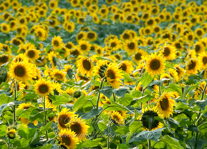 "Sunflowers © 2009 Nova Mackentley Traverse City, MI  SUN  <div class=""ss-paypal-button""><div class=""ss-paypal-add-to-cart-section""><div class=""ss-paypal-product-options""><h4>Mat Sizes</h4><ul><li><a href=""https://www.paypal.com/cgi-bin/webscr?cmd=_cart&business=T77V5VKCW4K2U&lc=US&item_name=Sunflowers%20%C2%A9%202009%20Nova%20Mackentley%20Traverse%20City%2C%20MI%20%20SUN&item_number=http%3A%2F%2Fwww.nightflightimages.com%2FGalleries-1%2FImpressions%2Fi-WtLKrLm&button_subtype=products&no_note=0&cn=Add%20special%20instructions%20to%20the%20seller%3A&no_shipping=2&currency_code=USD&weight_unit=lbs&add=1&bn=PP-ShopCartBF%3Abtn_cart_SM.gif%3ANonHosted&on0=Mat%20Sizes&option_select0=5%20x%207&option_amount0=10.00&option_select1=8%20x%2010&option_amount1=18.00&option_select2=11%20x%2014&option_amount2=28.00&option_select3=card&option_amount3=4.00&option_index=0&charset=utf-8&submit=&os0=5%20x%207"" target=""paypal""><span>5 x 7 $11.00 USD</span><img src=""https://www.paypalobjects.com/en_US/i/btn/btn_cart_SM.gif""></a></li><li><a href=""https://www.paypal.com/cgi-bin/webscr?cmd=_cart&business=T77V5VKCW4K2U&lc=US&item_name=Sunflowers%20%C2%A9%202009%20Nova%20Mackentley%20Traverse%20City%2C%20MI%20%20SUN&item_number=http%3A%2F%2Fwww.nightflightimages.com%2FGalleries-1%2FImpressions%2Fi-WtLKrLm&button_subtype=products&no_note=0&cn=Add%20special%20instructions%20to%20the%20seller%3A&no_shipping=2&currency_code=USD&weight_unit=lbs&add=1&bn=PP-ShopCartBF%3Abtn_cart_SM.gif%3ANonHosted&on0=Mat%20Sizes&option_select0=5%20x%207&option_amount0=10.00&option_select1=8%20x%2010&option_amount1=18.00&option_select2=11%20x%2014&option_amount2=28.00&option_select3=card&option_amount3=4.00&option_index=0&charset=utf-8&submit=&os0=8%20x%2010"" target=""paypal""><span>8 x 10 $19.00 USD</span><img src=""https://www.paypalobjects.com/en_US/i/btn/btn_cart_SM.gif""></a></li><li><a href=""https://www.paypal.com/cgi-bin/webscr?cmd=_cart&business=T77V5VKCW4K2U&lc=US&item_name=Sunflowers%20%C2%A9%202009%20Nova%20Mackentley%20Traverse%20City%2C%20MI%20%20SUN&item_number=http%3A%2F%2Fwww.nightflightimages.com%2FGalleries-1%2FImpressions%2Fi-WtLKrLm&button_subtype=products&no_note=0&cn=Add%20special%20instructions%20to%20the%20seller%3A&no_shipping=2&currency_code=USD&weight_unit=lbs&add=1&bn=PP-ShopCartBF%3Abtn_cart_SM.gif%3ANonHosted&on0=Mat%20Sizes&option_select0=5%20x%207&option_amount0=10.00&option_select1=8%20x%2010&option_amount1=18.00&option_select2=11%20x%2014&option_amount2=28.00&option_select3=card&option_amount3=4.00&option_index=0&charset=utf-8&submit=&os0=11%20x%2014"" target=""paypal""><span>11 x 14 $29.00 USD</span><img src=""https://www.paypalobjects.com/en_US/i/btn/btn_cart_SM.gif""></a></li><li><a href=""https://www.paypal.com/cgi-bin/webscr?cmd=_cart&business=T77V5VKCW4K2U&lc=US&item_name=Sunflowers%20%C2%A9%202009%20Nova%20Mackentley%20Traverse%20City%2C%20MI%20%20SUN&item_number=http%3A%2F%2Fwww.nightflightimages.com%2FGalleries-1%2FImpressions%2Fi-WtLKrLm&button_subtype=products&no_note=0&cn=Add%20special%20instructions%20to%20the%20seller%3A&no_shipping=2&currency_code=USD&weight_unit=lbs&add=1&bn=PP-ShopCartBF%3Abtn_cart_SM.gif%3ANonHosted&on0=Mat%20Sizes&option_select0=5%20x%207&option_amount0=10.00&option_select1=8%20x%2010&option_amount1=18.00&option_select2=11%20x%2014&option_amount2=28.00&option_select3=card&option_amount3=4.00&option_index=0&charset=utf-8&submit=&os0=card"" target=""paypal""><span>card $5.00 USD</span><img src=""https://www.paypalobjects.com/en_US/i/btn/btn_cart_SM.gif""></a></li></ul></div></div> <div class=""ss-paypal-view-cart-section""><a href=""https://www.paypal.com/cgi-bin/webscr?cmd=_cart&business=T77V5VKCW4K2U&display=1&item_name=Sunflowers%20%C2%A9%202009%20Nova%20Mackentley%20Traverse%20City%2C%20MI%20%20SUN&item_number=http%3A%2F%2Fwww.nightflightimages.com%2FGalleries-1%2FImpressions%2Fi-WtLKrLm&charset=utf-8&submit="" target=""paypal"" class=""ss-paypal-submit-button""><img src=""https://www.paypalobjects.com/en_US/i/btn/btn_viewcart_LG.gif""></a></div></div><div class=""ss-paypal-button-end""></div>"