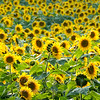 "Sunflowers © 2009 Nova Mackentley Traverse City, MI  SUN  <div class=""ss-paypal-button""><div class=""ss-paypal-add-to-cart-section""><div class=""ss-paypal-product-options""><h4>Mat Sizes</h4><ul><li><a href=""https://www.paypal.com/cgi-bin/webscr?cmd=_cart&amp;business=T77V5VKCW4K2U&amp;lc=US&amp;item_name=Sunflowers%20%C2%A9%202009%20Nova%20Mackentley%20Traverse%20City%2C%20MI%20%20SUN&amp;item_number=http%3A%2F%2Fwww.nightflightimages.com%2FGalleries-1%2FImpressions%2Fi-WtLKrLm&amp;button_subtype=products&amp;no_note=0&amp;cn=Add%20special%20instructions%20to%20the%20seller%3A&amp;no_shipping=2&amp;currency_code=USD&amp;weight_unit=lbs&amp;add=1&amp;bn=PP-ShopCartBF%3Abtn_cart_SM.gif%3ANonHosted&amp;on0=Mat%20Sizes&amp;option_select0=5%20x%207&amp;option_amount0=10.00&amp;option_select1=8%20x%2010&amp;option_amount1=18.00&amp;option_select2=11%20x%2014&amp;option_amount2=28.00&amp;option_select3=card&amp;option_amount3=4.00&amp;option_index=0&amp;charset=utf-8&amp;submit=&amp;os0=5%20x%207"" target=""paypal""><span>5 x 7 $11.00 USD</span><img src=""https://www.paypalobjects.com/en_US/i/btn/btn_cart_SM.gif""></a></li><li><a href=""https://www.paypal.com/cgi-bin/webscr?cmd=_cart&amp;business=T77V5VKCW4K2U&amp;lc=US&amp;item_name=Sunflowers%20%C2%A9%202009%20Nova%20Mackentley%20Traverse%20City%2C%20MI%20%20SUN&amp;item_number=http%3A%2F%2Fwww.nightflightimages.com%2FGalleries-1%2FImpressions%2Fi-WtLKrLm&amp;button_subtype=products&amp;no_note=0&amp;cn=Add%20special%20instructions%20to%20the%20seller%3A&amp;no_shipping=2&amp;currency_code=USD&amp;weight_unit=lbs&amp;add=1&amp;bn=PP-ShopCartBF%3Abtn_cart_SM.gif%3ANonHosted&amp;on0=Mat%20Sizes&amp;option_select0=5%20x%207&amp;option_amount0=10.00&amp;option_select1=8%20x%2010&amp;option_amount1=18.00&amp;option_select2=11%20x%2014&amp;option_amount2=28.00&amp;option_select3=card&amp;option_amount3=4.00&amp;option_index=0&amp;charset=utf-8&amp;submit=&amp;os0=8%20x%2010"" target=""paypal""><span>8 x 10 $19.00 USD</span><img src=""https://www.paypalobjects.com/en_US/i/btn/btn_cart_SM.gif""></a></li><li><a href=""https://www.paypal.com/cgi-bin/webscr?cmd=_cart&amp;business=T77V5VKCW4K2U&amp;lc=US&amp;item_name=Sunflowers%20%C2%A9%202009%20Nova%20Mackentley%20Traverse%20City%2C%20MI%20%20SUN&amp;item_number=http%3A%2F%2Fwww.nightflightimages.com%2FGalleries-1%2FImpressions%2Fi-WtLKrLm&amp;button_subtype=products&amp;no_note=0&amp;cn=Add%20special%20instructions%20to%20the%20seller%3A&amp;no_shipping=2&amp;currency_code=USD&amp;weight_unit=lbs&amp;add=1&amp;bn=PP-ShopCartBF%3Abtn_cart_SM.gif%3ANonHosted&amp;on0=Mat%20Sizes&amp;option_select0=5%20x%207&amp;option_amount0=10.00&amp;option_select1=8%20x%2010&amp;option_amount1=18.00&amp;option_select2=11%20x%2014&amp;option_amount2=28.00&amp;option_select3=card&amp;option_amount3=4.00&amp;option_index=0&amp;charset=utf-8&amp;submit=&amp;os0=11%20x%2014"" target=""paypal""><span>11 x 14 $29.00 USD</span><img src=""https://www.paypalobjects.com/en_US/i/btn/btn_cart_SM.gif""></a></li><li><a href=""https://www.paypal.com/cgi-bin/webscr?cmd=_cart&amp;business=T77V5VKCW4K2U&amp;lc=US&amp;item_name=Sunflowers%20%C2%A9%202009%20Nova%20Mackentley%20Traverse%20City%2C%20MI%20%20SUN&amp;item_number=http%3A%2F%2Fwww.nightflightimages.com%2FGalleries-1%2FImpressions%2Fi-WtLKrLm&amp;button_subtype=products&amp;no_note=0&amp;cn=Add%20special%20instructions%20to%20the%20seller%3A&amp;no_shipping=2&amp;currency_code=USD&amp;weight_unit=lbs&amp;add=1&amp;bn=PP-ShopCartBF%3Abtn_cart_SM.gif%3ANonHosted&amp;on0=Mat%20Sizes&amp;option_select0=5%20x%207&amp;option_amount0=10.00&amp;option_select1=8%20x%2010&amp;option_amount1=18.00&amp;option_select2=11%20x%2014&amp;option_amount2=28.00&amp;option_select3=card&amp;option_amount3=4.00&amp;option_index=0&amp;charset=utf-8&amp;submit=&amp;os0=card"" target=""paypal""><span>card $5.00 USD</span><img src=""https://www.paypalobjects.com/en_US/i/btn/btn_cart_SM.gif""></a></li></ul></div></div> <div class=""ss-paypal-view-cart-section""><a href=""https://www.paypal.com/cgi-bin/webscr?cmd=_cart&amp;business=T77V5VKCW4K2U&amp;display=1&amp;item_name=Sunflowers%20%C2%A9%202009%20Nova%20Mackentley%20Traverse%20City%2C%20MI%20%20SUN&amp;item_number=http%3A%2F%2Fwww.nightflightimages.com%2FGalleries-1%2FImpressions%2Fi-WtLKrLm&amp;charset=utf-8&amp;submit="" target=""paypal"" class=""ss-paypal-submit-button""><img src=""https://www.paypalobjects.com/en_US/i/btn/btn_viewcart_LG.gif""></a></div></div><div class=""ss-paypal-button-end""></div>"