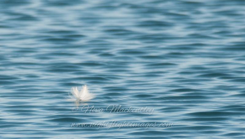 "feather on the water, © 2013 Nova Mackentley, Coastal ME  FEW  <div class=""ss-paypal-button""><div class=""ss-paypal-add-to-cart-section""><div class=""ss-paypal-product-options""><h4>Mat Sizes</h4><ul><li><a href=""https://www.paypal.com/cgi-bin/webscr?cmd=_cart&amp;business=T77V5VKCW4K2U&amp;lc=US&amp;item_name=feather%20on%20the%20water%2C%20%C2%A9%202013%20Nova%20Mackentley%2C%20Coastal%20ME%20%20FEW&amp;item_number=http%3A%2F%2Fwww.nightflightimages.com%2FGalleries-1%2FImpressions%2Fi-bp2kv9S&amp;button_subtype=products&amp;no_note=0&amp;cn=Add%20special%20instructions%20to%20the%20seller%3A&amp;no_shipping=2&amp;currency_code=USD&amp;weight_unit=lbs&amp;add=1&amp;bn=PP-ShopCartBF%3Abtn_cart_SM.gif%3ANonHosted&amp;on0=Mat%20Sizes&amp;option_select0=5%20x%207&amp;option_amount0=10.00&amp;option_select1=8%20x%2010&amp;option_amount1=18.00&amp;option_select2=11%20x%2014&amp;option_amount2=28.00&amp;option_select3=card&amp;option_amount3=4.00&amp;option_index=0&amp;charset=utf-8&amp;submit=&amp;os0=5%20x%207"" target=""paypal""><span>5 x 7 $11.00 USD</span><img src=""https://www.paypalobjects.com/en_US/i/btn/btn_cart_SM.gif""></a></li><li><a href=""https://www.paypal.com/cgi-bin/webscr?cmd=_cart&amp;business=T77V5VKCW4K2U&amp;lc=US&amp;item_name=feather%20on%20the%20water%2C%20%C2%A9%202013%20Nova%20Mackentley%2C%20Coastal%20ME%20%20FEW&amp;item_number=http%3A%2F%2Fwww.nightflightimages.com%2FGalleries-1%2FImpressions%2Fi-bp2kv9S&amp;button_subtype=products&amp;no_note=0&amp;cn=Add%20special%20instructions%20to%20the%20seller%3A&amp;no_shipping=2&amp;currency_code=USD&amp;weight_unit=lbs&amp;add=1&amp;bn=PP-ShopCartBF%3Abtn_cart_SM.gif%3ANonHosted&amp;on0=Mat%20Sizes&amp;option_select0=5%20x%207&amp;option_amount0=10.00&amp;option_select1=8%20x%2010&amp;option_amount1=18.00&amp;option_select2=11%20x%2014&amp;option_amount2=28.00&amp;option_select3=card&amp;option_amount3=4.00&amp;option_index=0&amp;charset=utf-8&amp;submit=&amp;os0=8%20x%2010"" target=""paypal""><span>8 x 10 $19.00 USD</span><img src=""https://www.paypalobjects.com/en_US/i/btn/btn_cart_SM.gif""></a></li><li><a href=""https://www.paypal.com/cgi-bin/webscr?cmd=_cart&amp;business=T77V5VKCW4K2U&amp;lc=US&amp;item_name=feather%20on%20the%20water%2C%20%C2%A9%202013%20Nova%20Mackentley%2C%20Coastal%20ME%20%20FEW&amp;item_number=http%3A%2F%2Fwww.nightflightimages.com%2FGalleries-1%2FImpressions%2Fi-bp2kv9S&amp;button_subtype=products&amp;no_note=0&amp;cn=Add%20special%20instructions%20to%20the%20seller%3A&amp;no_shipping=2&amp;currency_code=USD&amp;weight_unit=lbs&amp;add=1&amp;bn=PP-ShopCartBF%3Abtn_cart_SM.gif%3ANonHosted&amp;on0=Mat%20Sizes&amp;option_select0=5%20x%207&amp;option_amount0=10.00&amp;option_select1=8%20x%2010&amp;option_amount1=18.00&amp;option_select2=11%20x%2014&amp;option_amount2=28.00&amp;option_select3=card&amp;option_amount3=4.00&amp;option_index=0&amp;charset=utf-8&amp;submit=&amp;os0=11%20x%2014"" target=""paypal""><span>11 x 14 $29.00 USD</span><img src=""https://www.paypalobjects.com/en_US/i/btn/btn_cart_SM.gif""></a></li><li><a href=""https://www.paypal.com/cgi-bin/webscr?cmd=_cart&amp;business=T77V5VKCW4K2U&amp;lc=US&amp;item_name=feather%20on%20the%20water%2C%20%C2%A9%202013%20Nova%20Mackentley%2C%20Coastal%20ME%20%20FEW&amp;item_number=http%3A%2F%2Fwww.nightflightimages.com%2FGalleries-1%2FImpressions%2Fi-bp2kv9S&amp;button_subtype=products&amp;no_note=0&amp;cn=Add%20special%20instructions%20to%20the%20seller%3A&amp;no_shipping=2&amp;currency_code=USD&amp;weight_unit=lbs&amp;add=1&amp;bn=PP-ShopCartBF%3Abtn_cart_SM.gif%3ANonHosted&amp;on0=Mat%20Sizes&amp;option_select0=5%20x%207&amp;option_amount0=10.00&amp;option_select1=8%20x%2010&amp;option_amount1=18.00&amp;option_select2=11%20x%2014&amp;option_amount2=28.00&amp;option_select3=card&amp;option_amount3=4.00&amp;option_index=0&amp;charset=utf-8&amp;submit=&amp;os0=card"" target=""paypal""><span>card $5.00 USD</span><img src=""https://www.paypalobjects.com/en_US/i/btn/btn_cart_SM.gif""></a></li></ul></div></div> <div class=""ss-paypal-view-cart-section""><a href=""https://www.paypal.com/cgi-bin/webscr?cmd=_cart&amp;business=T77V5VKCW4K2U&amp;display=1&amp;item_name=feather%20on%20the%20water%2C%20%C2%A9%202013%20Nova%20Mackentley%2C%20Coastal%20ME%20%20FEW&amp;item_number=http%3A%2F%2Fwww.nightflightimages.com%2FGalleries-1%2FImpressions%2Fi-bp2kv9S&amp;charset=utf-8&amp;submit="" target=""paypal"" class=""ss-paypal-submit-button""><img src=""https://www.paypalobjects.com/en_US/i/btn/btn_viewcart_LG.gif""></a></div></div><div class=""ss-paypal-button-end""></div>"