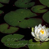 "Water Lily © 2001 C. M. Neri Chippewa County, MI WALY  <div class=""ss-paypal-button""><div class=""ss-paypal-add-to-cart-section""><div class=""ss-paypal-product-options""><h4>Mat Sizes</h4><ul><li><a href=""https://www.paypal.com/cgi-bin/webscr?cmd=_cart&amp;business=T77V5VKCW4K2U&amp;lc=US&amp;item_name=Water%20Lily%20%C2%A9%202001%20C.%20M.%20Neri%20Chippewa%20County%2C%20MI%20WALY&amp;item_number=http%3A%2F%2Fwww.nightflightimages.com%2FGalleries-1%2FTravels%2Fi-gBPvtv3&amp;button_subtype=products&amp;no_note=0&amp;cn=Add%20special%20instructions%20to%20the%20seller%3A&amp;no_shipping=2&amp;currency_code=USD&amp;weight_unit=lbs&amp;add=1&amp;bn=PP-ShopCartBF%3Abtn_cart_SM.gif%3ANonHosted&amp;on0=Mat%20Sizes&amp;option_select0=5%20x%207&amp;option_amount0=10.00&amp;option_select1=8%20x%2010&amp;option_amount1=18.00&amp;option_select2=11%20x%2014&amp;option_amount2=28.00&amp;option_select3=card&amp;option_amount3=4.00&amp;option_index=0&amp;charset=utf-8&amp;submit=&amp;os0=5%20x%207"" target=""paypal""><span>5 x 7 $11.00 USD</span><img src=""https://www.paypalobjects.com/en_US/i/btn/btn_cart_SM.gif""></a></li><li><a href=""https://www.paypal.com/cgi-bin/webscr?cmd=_cart&amp;business=T77V5VKCW4K2U&amp;lc=US&amp;item_name=Water%20Lily%20%C2%A9%202001%20C.%20M.%20Neri%20Chippewa%20County%2C%20MI%20WALY&amp;item_number=http%3A%2F%2Fwww.nightflightimages.com%2FGalleries-1%2FTravels%2Fi-gBPvtv3&amp;button_subtype=products&amp;no_note=0&amp;cn=Add%20special%20instructions%20to%20the%20seller%3A&amp;no_shipping=2&amp;currency_code=USD&amp;weight_unit=lbs&amp;add=1&amp;bn=PP-ShopCartBF%3Abtn_cart_SM.gif%3ANonHosted&amp;on0=Mat%20Sizes&amp;option_select0=5%20x%207&amp;option_amount0=10.00&amp;option_select1=8%20x%2010&amp;option_amount1=18.00&amp;option_select2=11%20x%2014&amp;option_amount2=28.00&amp;option_select3=card&amp;option_amount3=4.00&amp;option_index=0&amp;charset=utf-8&amp;submit=&amp;os0=8%20x%2010"" target=""paypal""><span>8 x 10 $19.00 USD</span><img src=""https://www.paypalobjects.com/en_US/i/btn/btn_cart_SM.gif""></a></li><li><a href=""https://www.paypal.com/cgi-bin/webscr?cmd=_cart&amp;business=T77V5VKCW4K2U&amp;lc=US&amp;item_name=Water%20Lily%20%C2%A9%202001%20C.%20M.%20Neri%20Chippewa%20County%2C%20MI%20WALY&amp;item_number=http%3A%2F%2Fwww.nightflightimages.com%2FGalleries-1%2FTravels%2Fi-gBPvtv3&amp;button_subtype=products&amp;no_note=0&amp;cn=Add%20special%20instructions%20to%20the%20seller%3A&amp;no_shipping=2&amp;currency_code=USD&amp;weight_unit=lbs&amp;add=1&amp;bn=PP-ShopCartBF%3Abtn_cart_SM.gif%3ANonHosted&amp;on0=Mat%20Sizes&amp;option_select0=5%20x%207&amp;option_amount0=10.00&amp;option_select1=8%20x%2010&amp;option_amount1=18.00&amp;option_select2=11%20x%2014&amp;option_amount2=28.00&amp;option_select3=card&amp;option_amount3=4.00&amp;option_index=0&amp;charset=utf-8&amp;submit=&amp;os0=11%20x%2014"" target=""paypal""><span>11 x 14 $29.00 USD</span><img src=""https://www.paypalobjects.com/en_US/i/btn/btn_cart_SM.gif""></a></li><li><a href=""https://www.paypal.com/cgi-bin/webscr?cmd=_cart&amp;business=T77V5VKCW4K2U&amp;lc=US&amp;item_name=Water%20Lily%20%C2%A9%202001%20C.%20M.%20Neri%20Chippewa%20County%2C%20MI%20WALY&amp;item_number=http%3A%2F%2Fwww.nightflightimages.com%2FGalleries-1%2FTravels%2Fi-gBPvtv3&amp;button_subtype=products&amp;no_note=0&amp;cn=Add%20special%20instructions%20to%20the%20seller%3A&amp;no_shipping=2&amp;currency_code=USD&amp;weight_unit=lbs&amp;add=1&amp;bn=PP-ShopCartBF%3Abtn_cart_SM.gif%3ANonHosted&amp;on0=Mat%20Sizes&amp;option_select0=5%20x%207&amp;option_amount0=10.00&amp;option_select1=8%20x%2010&amp;option_amount1=18.00&amp;option_select2=11%20x%2014&amp;option_amount2=28.00&amp;option_select3=card&amp;option_amount3=4.00&amp;option_index=0&amp;charset=utf-8&amp;submit=&amp;os0=card"" target=""paypal""><span>card $5.00 USD</span><img src=""https://www.paypalobjects.com/en_US/i/btn/btn_cart_SM.gif""></a></li></ul></div></div> <div class=""ss-paypal-view-cart-section""><a href=""https://www.paypal.com/cgi-bin/webscr?cmd=_cart&amp;business=T77V5VKCW4K2U&amp;display=1&amp;item_name=Water%20Lily%20%C2%A9%202001%20C.%20M.%20Neri%20Chippewa%20County%2C%20MI%20WALY&amp;item_number=http%3A%2F%2Fwww.nightflightimages.com%2FGalleries-1%2FTravels%2Fi-gBPvtv3&amp;charset=utf-8&amp;submit="" target=""paypal"" class=""ss-paypal-submit-button""><img src=""https://www.paypalobjects.com/en_US/i/btn/btn_viewcart_LG.gif""></a></div></div><div class=""ss-paypal-button-end""></div>"