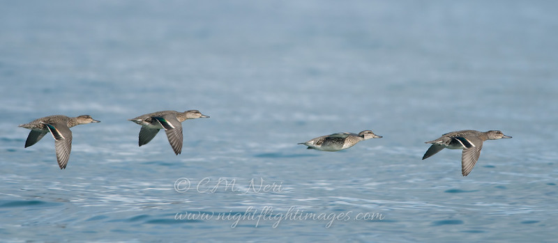 "Green-winged Teal over Lake Superior © 2008 C. M. Neri.  Whitefish Point, MI GWTE  <div class=""ss-paypal-button""><div class=""ss-paypal-add-to-cart-section""><div class=""ss-paypal-product-options""><h4>Mat Sizes</h4><ul><li><a href=""https://www.paypal.com/cgi-bin/webscr?cmd=_cart&business=T77V5VKCW4K2U&lc=US&item_name=Green-winged%20Teal%20over%20Lake%20Superior%20%C2%A9%202008%20C.%20M.%20Neri.%20%20Whitefish%20Point%2C%20MI%20GWTE&item_number=http%3A%2F%2Fwww.nightflightimages.com%2FGalleries-1%2FImpressions%2Fi-xHJtgcq&button_subtype=products&no_note=0&cn=Add%20special%20instructions%20to%20the%20seller%3A&no_shipping=2&currency_code=USD&weight_unit=lbs&add=1&bn=PP-ShopCartBF%3Abtn_cart_SM.gif%3ANonHosted&on0=Mat%20Sizes&option_select0=5%20x%207&option_amount0=10.00&option_select1=8%20x%2010&option_amount1=18.00&option_select2=11%20x%2014&option_amount2=28.00&option_select3=card&option_amount3=4.00&option_index=0&charset=utf-8&submit=&os0=5%20x%207"" target=""paypal""><span>5 x 7 $11.00 USD</span><img src=""https://www.paypalobjects.com/en_US/i/btn/btn_cart_SM.gif""></a></li><li><a href=""https://www.paypal.com/cgi-bin/webscr?cmd=_cart&business=T77V5VKCW4K2U&lc=US&item_name=Green-winged%20Teal%20over%20Lake%20Superior%20%C2%A9%202008%20C.%20M.%20Neri.%20%20Whitefish%20Point%2C%20MI%20GWTE&item_number=http%3A%2F%2Fwww.nightflightimages.com%2FGalleries-1%2FImpressions%2Fi-xHJtgcq&button_subtype=products&no_note=0&cn=Add%20special%20instructions%20to%20the%20seller%3A&no_shipping=2&currency_code=USD&weight_unit=lbs&add=1&bn=PP-ShopCartBF%3Abtn_cart_SM.gif%3ANonHosted&on0=Mat%20Sizes&option_select0=5%20x%207&option_amount0=10.00&option_select1=8%20x%2010&option_amount1=18.00&option_select2=11%20x%2014&option_amount2=28.00&option_select3=card&option_amount3=4.00&option_index=0&charset=utf-8&submit=&os0=8%20x%2010"" target=""paypal""><span>8 x 10 $19.00 USD</span><img src=""https://www.paypalobjects.com/en_US/i/btn/btn_cart_SM.gif""></a></li><li><a href=""https://www.paypal.com/cgi-bin/webscr?cmd=_cart&business=T77V5VKCW4K2U&lc=US&item_name=Green-winged%20Teal%20over%20Lake%20Superior%20%C2%A9%202008%20C.%20M.%20Neri.%20%20Whitefish%20Point%2C%20MI%20GWTE&item_number=http%3A%2F%2Fwww.nightflightimages.com%2FGalleries-1%2FImpressions%2Fi-xHJtgcq&button_subtype=products&no_note=0&cn=Add%20special%20instructions%20to%20the%20seller%3A&no_shipping=2&currency_code=USD&weight_unit=lbs&add=1&bn=PP-ShopCartBF%3Abtn_cart_SM.gif%3ANonHosted&on0=Mat%20Sizes&option_select0=5%20x%207&option_amount0=10.00&option_select1=8%20x%2010&option_amount1=18.00&option_select2=11%20x%2014&option_amount2=28.00&option_select3=card&option_amount3=4.00&option_index=0&charset=utf-8&submit=&os0=11%20x%2014"" target=""paypal""><span>11 x 14 $29.00 USD</span><img src=""https://www.paypalobjects.com/en_US/i/btn/btn_cart_SM.gif""></a></li><li><a href=""https://www.paypal.com/cgi-bin/webscr?cmd=_cart&business=T77V5VKCW4K2U&lc=US&item_name=Green-winged%20Teal%20over%20Lake%20Superior%20%C2%A9%202008%20C.%20M.%20Neri.%20%20Whitefish%20Point%2C%20MI%20GWTE&item_number=http%3A%2F%2Fwww.nightflightimages.com%2FGalleries-1%2FImpressions%2Fi-xHJtgcq&button_subtype=products&no_note=0&cn=Add%20special%20instructions%20to%20the%20seller%3A&no_shipping=2&currency_code=USD&weight_unit=lbs&add=1&bn=PP-ShopCartBF%3Abtn_cart_SM.gif%3ANonHosted&on0=Mat%20Sizes&option_select0=5%20x%207&option_amount0=10.00&option_select1=8%20x%2010&option_amount1=18.00&option_select2=11%20x%2014&option_amount2=28.00&option_select3=card&option_amount3=4.00&option_index=0&charset=utf-8&submit=&os0=card"" target=""paypal""><span>card $5.00 USD</span><img src=""https://www.paypalobjects.com/en_US/i/btn/btn_cart_SM.gif""></a></li></ul></div></div> <div class=""ss-paypal-view-cart-section""><a href=""https://www.paypal.com/cgi-bin/webscr?cmd=_cart&business=T77V5VKCW4K2U&display=1&item_name=Green-winged%20Teal%20over%20Lake%20Superior%20%C2%A9%202008%20C.%20M.%20Neri.%20%20Whitefish%20Point%2C%20MI%20GWTE&item_number=http%3A%2F%2Fwww.nightflightimages.com%2FGalleries-1%2FImpressions%2Fi-xHJtgcq&charset=utf-8&submit="" target=""paypal"" class=""ss-paypal-submit-button""><img src=""https://www.paypalobjects.com/en_US/i/btn/btn_viewcart_LG.gif""></a></div></div><div class=""ss-paypal-button-end""></div>"