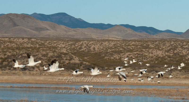 Snow Geese & Sandhill Cranes in flight © 2010 Nova Mackentley Bosque del Apache NWR, NM SCF long