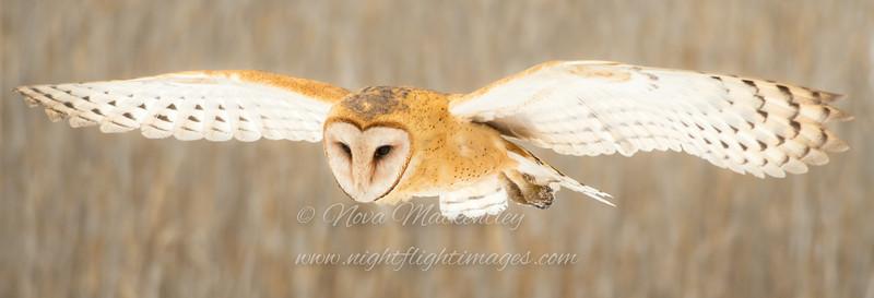 Barn Owl hunting © 2017 Nova Mackentley<br /> Northern UT<br /> BNL