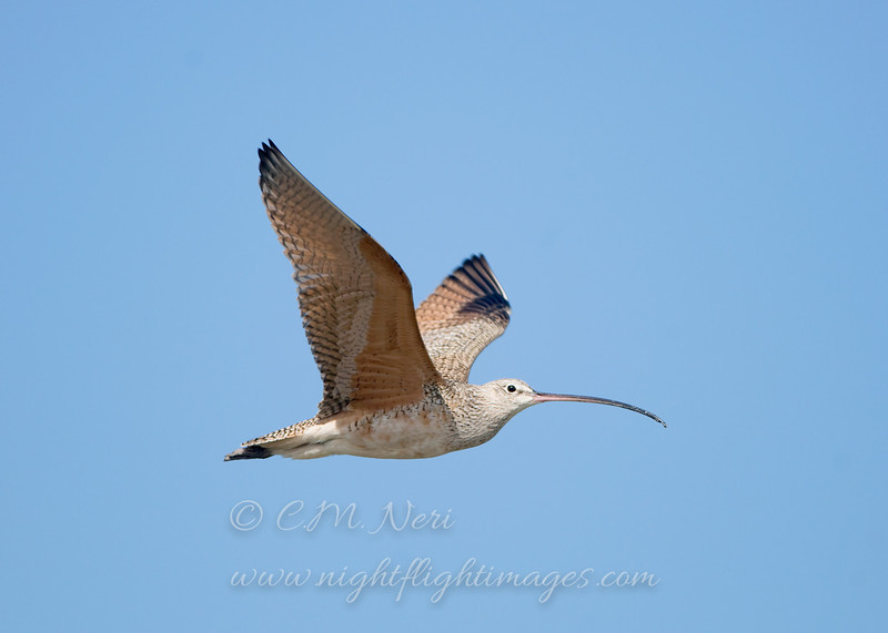 "Long-billed Curlew © 2009 C. M. Neri.  Laguna Atascosa NWR, TX LBCU  <div class=""ss-paypal-button""><div class=""ss-paypal-add-to-cart-section""><div class=""ss-paypal-product-options""><h4>Mat Sizes</h4><ul><li><a href=""https://www.paypal.com/cgi-bin/webscr?cmd=_cart&amp;business=T77V5VKCW4K2U&amp;lc=US&amp;item_name=Long-billed%20Curlew%20%C2%A9%202009%20C.%20M.%20Neri.%20%20Laguna%20Atascosa%20NWR%2C%20TX%20LBCU&amp;item_number=http%3A%2F%2Fwww.nightflightimages.com%2FGalleries-1%2FShore%2Fi-4rzFbtH&amp;button_subtype=products&amp;no_note=0&amp;cn=Add%20special%20instructions%20to%20the%20seller%3A&amp;no_shipping=2&amp;currency_code=USD&amp;weight_unit=lbs&amp;add=1&amp;bn=PP-ShopCartBF%3Abtn_cart_SM.gif%3ANonHosted&amp;on0=Mat%20Sizes&amp;option_select0=5%20x%207&amp;option_amount0=10.00&amp;option_select1=8%20x%2010&amp;option_amount1=18.00&amp;option_select2=11%20x%2014&amp;option_amount2=28.00&amp;option_select3=card&amp;option_amount3=4.00&amp;option_index=0&amp;charset=utf-8&amp;submit=&amp;os0=5%20x%207"" target=""paypal""><span>5 x 7 $11.00 USD</span><img src=""https://www.paypalobjects.com/en_US/i/btn/btn_cart_SM.gif""></a></li><li><a href=""https://www.paypal.com/cgi-bin/webscr?cmd=_cart&amp;business=T77V5VKCW4K2U&amp;lc=US&amp;item_name=Long-billed%20Curlew%20%C2%A9%202009%20C.%20M.%20Neri.%20%20Laguna%20Atascosa%20NWR%2C%20TX%20LBCU&amp;item_number=http%3A%2F%2Fwww.nightflightimages.com%2FGalleries-1%2FShore%2Fi-4rzFbtH&amp;button_subtype=products&amp;no_note=0&amp;cn=Add%20special%20instructions%20to%20the%20seller%3A&amp;no_shipping=2&amp;currency_code=USD&amp;weight_unit=lbs&amp;add=1&amp;bn=PP-ShopCartBF%3Abtn_cart_SM.gif%3ANonHosted&amp;on0=Mat%20Sizes&amp;option_select0=5%20x%207&amp;option_amount0=10.00&amp;option_select1=8%20x%2010&amp;option_amount1=18.00&amp;option_select2=11%20x%2014&amp;option_amount2=28.00&amp;option_select3=card&amp;option_amount3=4.00&amp;option_index=0&amp;charset=utf-8&amp;submit=&amp;os0=8%20x%2010"" target=""paypal""><span>8 x 10 $19.00 USD</span><img src=""https://www.paypalobjects.com/en_US/i/btn/btn_cart_SM.gif""></a></li><li><a href=""https://www.paypal.com/cgi-bin/webscr?cmd=_cart&amp;business=T77V5VKCW4K2U&amp;lc=US&amp;item_name=Long-billed%20Curlew%20%C2%A9%202009%20C.%20M.%20Neri.%20%20Laguna%20Atascosa%20NWR%2C%20TX%20LBCU&amp;item_number=http%3A%2F%2Fwww.nightflightimages.com%2FGalleries-1%2FShore%2Fi-4rzFbtH&amp;button_subtype=products&amp;no_note=0&amp;cn=Add%20special%20instructions%20to%20the%20seller%3A&amp;no_shipping=2&amp;currency_code=USD&amp;weight_unit=lbs&amp;add=1&amp;bn=PP-ShopCartBF%3Abtn_cart_SM.gif%3ANonHosted&amp;on0=Mat%20Sizes&amp;option_select0=5%20x%207&amp;option_amount0=10.00&amp;option_select1=8%20x%2010&amp;option_amount1=18.00&amp;option_select2=11%20x%2014&amp;option_amount2=28.00&amp;option_select3=card&amp;option_amount3=4.00&amp;option_index=0&amp;charset=utf-8&amp;submit=&amp;os0=11%20x%2014"" target=""paypal""><span>11 x 14 $29.00 USD</span><img src=""https://www.paypalobjects.com/en_US/i/btn/btn_cart_SM.gif""></a></li><li><a href=""https://www.paypal.com/cgi-bin/webscr?cmd=_cart&amp;business=T77V5VKCW4K2U&amp;lc=US&amp;item_name=Long-billed%20Curlew%20%C2%A9%202009%20C.%20M.%20Neri.%20%20Laguna%20Atascosa%20NWR%2C%20TX%20LBCU&amp;item_number=http%3A%2F%2Fwww.nightflightimages.com%2FGalleries-1%2FShore%2Fi-4rzFbtH&amp;button_subtype=products&amp;no_note=0&amp;cn=Add%20special%20instructions%20to%20the%20seller%3A&amp;no_shipping=2&amp;currency_code=USD&amp;weight_unit=lbs&amp;add=1&amp;bn=PP-ShopCartBF%3Abtn_cart_SM.gif%3ANonHosted&amp;on0=Mat%20Sizes&amp;option_select0=5%20x%207&amp;option_amount0=10.00&amp;option_select1=8%20x%2010&amp;option_amount1=18.00&amp;option_select2=11%20x%2014&amp;option_amount2=28.00&amp;option_select3=card&amp;option_amount3=4.00&amp;option_index=0&amp;charset=utf-8&amp;submit=&amp;os0=card"" target=""paypal""><span>card $5.00 USD</span><img src=""https://www.paypalobjects.com/en_US/i/btn/btn_cart_SM.gif""></a></li></ul></div></div> <div class=""ss-paypal-view-cart-section""><a href=""https://www.paypal.com/cgi-bin/webscr?cmd=_cart&amp;business=T77V5VKCW4K2U&amp;display=1&amp;item_name=Long-billed%20Curlew%20%C2%A9%202009%20C.%20M.%20Neri.%20%20Laguna%20Atascosa%20NWR%2C%20TX%20LBCU&amp;item_number=http%3A%2F%2Fwww.nightflightimages.com%2FGalleries-1%2FShore%2Fi-4rzFbtH&amp;charset=utf-8&amp;submit="" target=""paypal"" class=""ss-paypal-submit-button""><img src=""https://www.paypalobjects.com/en_US/i/btn/btn_viewcart_LG.gif""></a></div></div><div class=""ss-paypal-button-end""></div>"