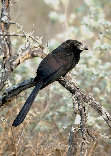 "Groove-billed Ani © 2009 C. M. Neri.  Falcon Dam State Park, TX GBAN  <div class=""ss-paypal-button""> <div class=""ss-paypal-add-to-cart-section""><div class=""ss-paypal-product-options""> <h4>Mat Sizes</h4> <ul> <li><a href=""https://www.paypal.com/cgi-bin/webscr?cmd=_cart&amp;business=T77V5VKCW4K2U&amp;lc=US&amp;item_name=Groove-billed%20Ani%20%C2%A9%202009%20C.%20M.%20Neri.%20%20Falcon%20Dam%20State%20Park%2C%20TX%20GBAN&amp;item_number=http%3A%2F%2Fwww.nightflightimages.com%2FGalleries-1%2FLower-Rio-Grande-Valley-TX%2Fi-4sdH5MX&amp;button_subtype=products&amp;no_note=0&amp;cn=Add%20special%20instructions%20to%20the%20seller%3A&amp;no_shipping=2&amp;currency_code=USD&amp;weight_unit=lbs&amp;add=1&amp;bn=PP-ShopCartBF%3Abtn_cart_SM.gif%3ANonHosted&amp;on0=Mat%20Sizes&amp;option_select0=5%20x%207&amp;option_amount0=10.00&amp;option_select1=8%20x%2010&amp;option_amount1=18.00&amp;option_select2=11%20x%2014&amp;option_amount2=28.00&amp;option_select3=card&amp;option_amount3=4.00&amp;option_index=0&amp;submit=&amp;os0=5%20x%207"" target=""paypal""><span>5 x 7 $10.00 USD</span><img src=""https://www.paypalobjects.com/en_US/i/btn/btn_cart_SM.gif""></a></li> <li><a href=""https://www.paypal.com/cgi-bin/webscr?cmd=_cart&amp;business=T77V5VKCW4K2U&amp;lc=US&amp;item_name=Groove-billed%20Ani%20%C2%A9%202009%20C.%20M.%20Neri.%20%20Falcon%20Dam%20State%20Park%2C%20TX%20GBAN&amp;item_number=http%3A%2F%2Fwww.nightflightimages.com%2FGalleries-1%2FLower-Rio-Grande-Valley-TX%2Fi-4sdH5MX&amp;button_subtype=products&amp;no_note=0&amp;cn=Add%20special%20instructions%20to%20the%20seller%3A&amp;no_shipping=2&amp;currency_code=USD&amp;weight_unit=lbs&amp;add=1&amp;bn=PP-ShopCartBF%3Abtn_cart_SM.gif%3ANonHosted&amp;on0=Mat%20Sizes&amp;option_select0=5%20x%207&amp;option_amount0=10.00&amp;option_select1=8%20x%2010&amp;option_amount1=18.00&amp;option_select2=11%20x%2014&amp;option_amount2=28.00&amp;option_select3=card&amp;option_amount3=4.00&amp;option_index=0&amp;submit=&amp;os0=8%20x%2010"" target=""paypal""><span>8 x 10 $18.00 USD</span><img src=""https://www.paypalobjects.com/en_US/i/btn/btn_cart_SM.gif""></a></li> <li><a href=""https://www.paypal.com/cgi-bin/webscr?cmd=_cart&amp;business=T77V5VKCW4K2U&amp;lc=US&amp;item_name=Groove-billed%20Ani%20%C2%A9%202009%20C.%20M.%20Neri.%20%20Falcon%20Dam%20State%20Park%2C%20TX%20GBAN&amp;item_number=http%3A%2F%2Fwww.nightflightimages.com%2FGalleries-1%2FLower-Rio-Grande-Valley-TX%2Fi-4sdH5MX&amp;button_subtype=products&amp;no_note=0&amp;cn=Add%20special%20instructions%20to%20the%20seller%3A&amp;no_shipping=2&amp;currency_code=USD&amp;weight_unit=lbs&amp;add=1&amp;bn=PP-ShopCartBF%3Abtn_cart_SM.gif%3ANonHosted&amp;on0=Mat%20Sizes&amp;option_select0=5%20x%207&amp;option_amount0=10.00&amp;option_select1=8%20x%2010&amp;option_amount1=18.00&amp;option_select2=11%20x%2014&amp;option_amount2=28.00&amp;option_select3=card&amp;option_amount3=4.00&amp;option_index=0&amp;submit=&amp;os0=11%20x%2014"" target=""paypal""><span>11 x 14 $28.00 USD</span><img src=""https://www.paypalobjects.com/en_US/i/btn/btn_cart_SM.gif""></a></li> <li><a href=""https://www.paypal.com/cgi-bin/webscr?cmd=_cart&amp;business=T77V5VKCW4K2U&amp;lc=US&amp;item_name=Groove-billed%20Ani%20%C2%A9%202009%20C.%20M.%20Neri.%20%20Falcon%20Dam%20State%20Park%2C%20TX%20GBAN&amp;item_number=http%3A%2F%2Fwww.nightflightimages.com%2FGalleries-1%2FLower-Rio-Grande-Valley-TX%2Fi-4sdH5MX&amp;button_subtype=products&amp;no_note=0&amp;cn=Add%20special%20instructions%20to%20the%20seller%3A&amp;no_shipping=2&amp;currency_code=USD&amp;weight_unit=lbs&amp;add=1&amp;bn=PP-ShopCartBF%3Abtn_cart_SM.gif%3ANonHosted&amp;on0=Mat%20Sizes&amp;option_select0=5%20x%207&amp;option_amount0=10.00&amp;option_select1=8%20x%2010&amp;option_amount1=18.00&amp;option_select2=11%20x%2014&amp;option_amount2=28.00&amp;option_select3=card&amp;option_amount3=4.00&amp;option_index=0&amp;submit=&amp;os0=card"" target=""paypal""><span>card $4.00 USD</span><img src=""https://www.paypalobjects.com/en_US/i/btn/btn_cart_SM.gif""></a></li> </ul> </div></div> <div class=""ss-paypal-view-cart-section""><a href=""https://www.paypal.com/cgi-bin/webscr?cmd=_cart&amp;business=T77V5VKCW4K2U&amp;display=1&amp;item_name=Groove-billed%20Ani%20%C2%A9%202009%20C.%20M.%20Neri.%20%20Falcon%20Dam%20State%20Park%2C%20TX%20GBAN&amp;item_number=http%3A%2F%2Fwww.nightflightimages.com%2FGalleries-1%2FLower-Rio-Grande-Valley-TX%2Fi-4sdH5MX&amp;submit="" target=""paypal"" class=""ss-paypal-submit-button""><img src=""https://www.paypalobjects.com/en_US/i/btn/btn_viewcart_LG.gif""></a></div> </div><div class=""ss-paypal-button-end"" style=""""></div>"