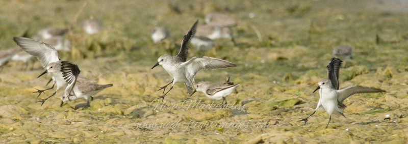 "Western Sandpipers © 2008 Nova Mackentley Laguna Atascosa NWR, TX WES  <div class=""ss-paypal-button""><div class=""ss-paypal-add-to-cart-section""><div class=""ss-paypal-product-options""><h4>Mat Sizes</h4><ul><li><a href=""https://www.paypal.com/cgi-bin/webscr?cmd=_cart&amp;business=T77V5VKCW4K2U&amp;lc=US&amp;item_name=Western%20Sandpipers%20%C2%A9%202008%20Nova%20Mackentley%20Laguna%20Atascosa%20NWR%2C%20TX%20WES&amp;item_number=http%3A%2F%2Fwww.nightflightimages.com%2FGalleries-1%2FShore%2Fi-56Lfnrz&amp;button_subtype=products&amp;no_note=0&amp;cn=Add%20special%20instructions%20to%20the%20seller%3A&amp;no_shipping=2&amp;currency_code=USD&amp;weight_unit=lbs&amp;add=1&amp;bn=PP-ShopCartBF%3Abtn_cart_SM.gif%3ANonHosted&amp;on0=Mat%20Sizes&amp;option_select0=5%20x%207&amp;option_amount0=10.00&amp;option_select1=8%20x%2010&amp;option_amount1=18.00&amp;option_select2=11%20x%2014&amp;option_amount2=28.00&amp;option_select3=card&amp;option_amount3=4.00&amp;option_index=0&amp;charset=utf-8&amp;submit=&amp;os0=5%20x%207"" target=""paypal""><span>5 x 7 $11.00 USD</span><img src=""https://www.paypalobjects.com/en_US/i/btn/btn_cart_SM.gif""></a></li><li><a href=""https://www.paypal.com/cgi-bin/webscr?cmd=_cart&amp;business=T77V5VKCW4K2U&amp;lc=US&amp;item_name=Western%20Sandpipers%20%C2%A9%202008%20Nova%20Mackentley%20Laguna%20Atascosa%20NWR%2C%20TX%20WES&amp;item_number=http%3A%2F%2Fwww.nightflightimages.com%2FGalleries-1%2FShore%2Fi-56Lfnrz&amp;button_subtype=products&amp;no_note=0&amp;cn=Add%20special%20instructions%20to%20the%20seller%3A&amp;no_shipping=2&amp;currency_code=USD&amp;weight_unit=lbs&amp;add=1&amp;bn=PP-ShopCartBF%3Abtn_cart_SM.gif%3ANonHosted&amp;on0=Mat%20Sizes&amp;option_select0=5%20x%207&amp;option_amount0=10.00&amp;option_select1=8%20x%2010&amp;option_amount1=18.00&amp;option_select2=11%20x%2014&amp;option_amount2=28.00&amp;option_select3=card&amp;option_amount3=4.00&amp;option_index=0&amp;charset=utf-8&amp;submit=&amp;os0=8%20x%2010"" target=""paypal""><span>8 x 10 $19.00 USD</span><img src=""https://www.paypalobjects.com/en_US/i/btn/btn_cart_SM.gif""></a></li><li><a href=""https://www.paypal.com/cgi-bin/webscr?cmd=_cart&amp;business=T77V5VKCW4K2U&amp;lc=US&amp;item_name=Western%20Sandpipers%20%C2%A9%202008%20Nova%20Mackentley%20Laguna%20Atascosa%20NWR%2C%20TX%20WES&amp;item_number=http%3A%2F%2Fwww.nightflightimages.com%2FGalleries-1%2FShore%2Fi-56Lfnrz&amp;button_subtype=products&amp;no_note=0&amp;cn=Add%20special%20instructions%20to%20the%20seller%3A&amp;no_shipping=2&amp;currency_code=USD&amp;weight_unit=lbs&amp;add=1&amp;bn=PP-ShopCartBF%3Abtn_cart_SM.gif%3ANonHosted&amp;on0=Mat%20Sizes&amp;option_select0=5%20x%207&amp;option_amount0=10.00&amp;option_select1=8%20x%2010&amp;option_amount1=18.00&amp;option_select2=11%20x%2014&amp;option_amount2=28.00&amp;option_select3=card&amp;option_amount3=4.00&amp;option_index=0&amp;charset=utf-8&amp;submit=&amp;os0=11%20x%2014"" target=""paypal""><span>11 x 14 $29.00 USD</span><img src=""https://www.paypalobjects.com/en_US/i/btn/btn_cart_SM.gif""></a></li><li><a href=""https://www.paypal.com/cgi-bin/webscr?cmd=_cart&amp;business=T77V5VKCW4K2U&amp;lc=US&amp;item_name=Western%20Sandpipers%20%C2%A9%202008%20Nova%20Mackentley%20Laguna%20Atascosa%20NWR%2C%20TX%20WES&amp;item_number=http%3A%2F%2Fwww.nightflightimages.com%2FGalleries-1%2FShore%2Fi-56Lfnrz&amp;button_subtype=products&amp;no_note=0&amp;cn=Add%20special%20instructions%20to%20the%20seller%3A&amp;no_shipping=2&amp;currency_code=USD&amp;weight_unit=lbs&amp;add=1&amp;bn=PP-ShopCartBF%3Abtn_cart_SM.gif%3ANonHosted&amp;on0=Mat%20Sizes&amp;option_select0=5%20x%207&amp;option_amount0=10.00&amp;option_select1=8%20x%2010&amp;option_amount1=18.00&amp;option_select2=11%20x%2014&amp;option_amount2=28.00&amp;option_select3=card&amp;option_amount3=4.00&amp;option_index=0&amp;charset=utf-8&amp;submit=&amp;os0=card"" target=""paypal""><span>card $5.00 USD</span><img src=""https://www.paypalobjects.com/en_US/i/btn/btn_cart_SM.gif""></a></li></ul></div></div> <div class=""ss-paypal-view-cart-section""><a href=""https://www.paypal.com/cgi-bin/webscr?cmd=_cart&amp;business=T77V5VKCW4K2U&amp;display=1&amp;item_name=Western%20Sandpipers%20%C2%A9%202008%20Nova%20Mackentley%20Laguna%20Atascosa%20NWR%2C%20TX%20WES&amp;item_number=http%3A%2F%2Fwww.nightflightimages.com%2FGalleries-1%2FShore%2Fi-56Lfnrz&amp;charset=utf-8&amp;submit="" target=""paypal"" class=""ss-paypal-submit-button""><img src=""https://www.paypalobjects.com/en_US/i/btn/btn_viewcart_LG.gif""></a></div></div><div class=""ss-paypal-button-end""></div>"
