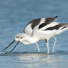 "American Avocets © 2008 Nova Mackentley Laguna Atascosa NWR, TX AV2  <div class=""ss-paypal-button""><div class=""ss-paypal-add-to-cart-section""><div class=""ss-paypal-product-options""><h4>Mat Sizes</h4><ul><li><a href=""https://www.paypal.com/cgi-bin/webscr?cmd=_cart&business=T77V5VKCW4K2U&lc=US&item_name=American%20Avocets%20%C2%A9%202008%20Nova%20Mackentley%20Laguna%20Atascosa%20NWR%2C%20TX%20AV2&item_number=http%3A%2F%2Fwww.nightflightimages.com%2FGalleries-1%2FShore%2Fi-6LTRBwn&button_subtype=products&no_note=0&cn=Add%20special%20instructions%20to%20the%20seller%3A&no_shipping=2&currency_code=USD&weight_unit=lbs&add=1&bn=PP-ShopCartBF%3Abtn_cart_SM.gif%3ANonHosted&on0=Mat%20Sizes&option_select0=5%20x%207&option_amount0=10.00&option_select1=8%20x%2010&option_amount1=18.00&option_select2=11%20x%2014&option_amount2=28.00&option_select3=card&option_amount3=4.00&option_index=0&charset=utf-8&submit=&os0=5%20x%207"" target=""paypal""><span>5 x 7 $11.00 USD</span><img src=""https://www.paypalobjects.com/en_US/i/btn/btn_cart_SM.gif""></a></li><li><a href=""https://www.paypal.com/cgi-bin/webscr?cmd=_cart&business=T77V5VKCW4K2U&lc=US&item_name=American%20Avocets%20%C2%A9%202008%20Nova%20Mackentley%20Laguna%20Atascosa%20NWR%2C%20TX%20AV2&item_number=http%3A%2F%2Fwww.nightflightimages.com%2FGalleries-1%2FShore%2Fi-6LTRBwn&button_subtype=products&no_note=0&cn=Add%20special%20instructions%20to%20the%20seller%3A&no_shipping=2&currency_code=USD&weight_unit=lbs&add=1&bn=PP-ShopCartBF%3Abtn_cart_SM.gif%3ANonHosted&on0=Mat%20Sizes&option_select0=5%20x%207&option_amount0=10.00&option_select1=8%20x%2010&option_amount1=18.00&option_select2=11%20x%2014&option_amount2=28.00&option_select3=card&option_amount3=4.00&option_index=0&charset=utf-8&submit=&os0=8%20x%2010"" target=""paypal""><span>8 x 10 $19.00 USD</span><img src=""https://www.paypalobjects.com/en_US/i/btn/btn_cart_SM.gif""></a></li><li><a href=""https://www.paypal.com/cgi-bin/webscr?cmd=_cart&business=T77V5VKCW4K2U&lc=US&item_name=American%20Avocets%20%C2%A9%202008%20Nova%20Mackentley%20Laguna%20Atascosa%20NWR%2C%20TX%20AV2&item_number=http%3A%2F%2Fwww.nightflightimages.com%2FGalleries-1%2FShore%2Fi-6LTRBwn&button_subtype=products&no_note=0&cn=Add%20special%20instructions%20to%20the%20seller%3A&no_shipping=2&currency_code=USD&weight_unit=lbs&add=1&bn=PP-ShopCartBF%3Abtn_cart_SM.gif%3ANonHosted&on0=Mat%20Sizes&option_select0=5%20x%207&option_amount0=10.00&option_select1=8%20x%2010&option_amount1=18.00&option_select2=11%20x%2014&option_amount2=28.00&option_select3=card&option_amount3=4.00&option_index=0&charset=utf-8&submit=&os0=11%20x%2014"" target=""paypal""><span>11 x 14 $29.00 USD</span><img src=""https://www.paypalobjects.com/en_US/i/btn/btn_cart_SM.gif""></a></li><li><a href=""https://www.paypal.com/cgi-bin/webscr?cmd=_cart&business=T77V5VKCW4K2U&lc=US&item_name=American%20Avocets%20%C2%A9%202008%20Nova%20Mackentley%20Laguna%20Atascosa%20NWR%2C%20TX%20AV2&item_number=http%3A%2F%2Fwww.nightflightimages.com%2FGalleries-1%2FShore%2Fi-6LTRBwn&button_subtype=products&no_note=0&cn=Add%20special%20instructions%20to%20the%20seller%3A&no_shipping=2&currency_code=USD&weight_unit=lbs&add=1&bn=PP-ShopCartBF%3Abtn_cart_SM.gif%3ANonHosted&on0=Mat%20Sizes&option_select0=5%20x%207&option_amount0=10.00&option_select1=8%20x%2010&option_amount1=18.00&option_select2=11%20x%2014&option_amount2=28.00&option_select3=card&option_amount3=4.00&option_index=0&charset=utf-8&submit=&os0=card"" target=""paypal""><span>card $5.00 USD</span><img src=""https://www.paypalobjects.com/en_US/i/btn/btn_cart_SM.gif""></a></li></ul></div></div> <div class=""ss-paypal-view-cart-section""><a href=""https://www.paypal.com/cgi-bin/webscr?cmd=_cart&business=T77V5VKCW4K2U&display=1&item_name=American%20Avocets%20%C2%A9%202008%20Nova%20Mackentley%20Laguna%20Atascosa%20NWR%2C%20TX%20AV2&item_number=http%3A%2F%2Fwww.nightflightimages.com%2FGalleries-1%2FShore%2Fi-6LTRBwn&charset=utf-8&submit="" target=""paypal"" class=""ss-paypal-submit-button""><img src=""https://www.paypalobjects.com/en_US/i/btn/btn_viewcart_LG.gif""></a></div></div><div class=""ss-paypal-button-end""></div>"