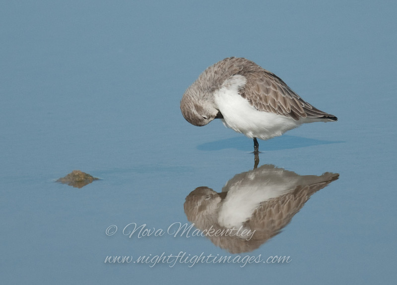 "Western Sandpiper © 2008 Nova Mackentley Laguna Atascosa NWR, TX WES  <div class=""ss-paypal-button""><div class=""ss-paypal-add-to-cart-section""><div class=""ss-paypal-product-options""><h4>Mat Sizes</h4><ul><li><a href=""https://www.paypal.com/cgi-bin/webscr?cmd=_cart&amp;business=T77V5VKCW4K2U&amp;lc=US&amp;item_name=Western%20Sandpiper%20%C2%A9%202008%20Nova%20Mackentley%20Laguna%20Atascosa%20NWR%2C%20TX%20WES&amp;item_number=http%3A%2F%2Fwww.nightflightimages.com%2FGalleries-1%2FShore%2Fi-6Rc2SGq&amp;button_subtype=products&amp;no_note=0&amp;cn=Add%20special%20instructions%20to%20the%20seller%3A&amp;no_shipping=2&amp;currency_code=USD&amp;weight_unit=lbs&amp;add=1&amp;bn=PP-ShopCartBF%3Abtn_cart_SM.gif%3ANonHosted&amp;on0=Mat%20Sizes&amp;option_select0=5%20x%207&amp;option_amount0=10.00&amp;option_select1=8%20x%2010&amp;option_amount1=18.00&amp;option_select2=11%20x%2014&amp;option_amount2=28.00&amp;option_select3=card&amp;option_amount3=4.00&amp;option_index=0&amp;charset=utf-8&amp;submit=&amp;os0=5%20x%207"" target=""paypal""><span>5 x 7 $11.00 USD</span><img src=""https://www.paypalobjects.com/en_US/i/btn/btn_cart_SM.gif""></a></li><li><a href=""https://www.paypal.com/cgi-bin/webscr?cmd=_cart&amp;business=T77V5VKCW4K2U&amp;lc=US&amp;item_name=Western%20Sandpiper%20%C2%A9%202008%20Nova%20Mackentley%20Laguna%20Atascosa%20NWR%2C%20TX%20WES&amp;item_number=http%3A%2F%2Fwww.nightflightimages.com%2FGalleries-1%2FShore%2Fi-6Rc2SGq&amp;button_subtype=products&amp;no_note=0&amp;cn=Add%20special%20instructions%20to%20the%20seller%3A&amp;no_shipping=2&amp;currency_code=USD&amp;weight_unit=lbs&amp;add=1&amp;bn=PP-ShopCartBF%3Abtn_cart_SM.gif%3ANonHosted&amp;on0=Mat%20Sizes&amp;option_select0=5%20x%207&amp;option_amount0=10.00&amp;option_select1=8%20x%2010&amp;option_amount1=18.00&amp;option_select2=11%20x%2014&amp;option_amount2=28.00&amp;option_select3=card&amp;option_amount3=4.00&amp;option_index=0&amp;charset=utf-8&amp;submit=&amp;os0=8%20x%2010"" target=""paypal""><span>8 x 10 $19.00 USD</span><img src=""https://www.paypalobjects.com/en_US/i/btn/btn_cart_SM.gif""></a></li><li><a href=""https://www.paypal.com/cgi-bin/webscr?cmd=_cart&amp;business=T77V5VKCW4K2U&amp;lc=US&amp;item_name=Western%20Sandpiper%20%C2%A9%202008%20Nova%20Mackentley%20Laguna%20Atascosa%20NWR%2C%20TX%20WES&amp;item_number=http%3A%2F%2Fwww.nightflightimages.com%2FGalleries-1%2FShore%2Fi-6Rc2SGq&amp;button_subtype=products&amp;no_note=0&amp;cn=Add%20special%20instructions%20to%20the%20seller%3A&amp;no_shipping=2&amp;currency_code=USD&amp;weight_unit=lbs&amp;add=1&amp;bn=PP-ShopCartBF%3Abtn_cart_SM.gif%3ANonHosted&amp;on0=Mat%20Sizes&amp;option_select0=5%20x%207&amp;option_amount0=10.00&amp;option_select1=8%20x%2010&amp;option_amount1=18.00&amp;option_select2=11%20x%2014&amp;option_amount2=28.00&amp;option_select3=card&amp;option_amount3=4.00&amp;option_index=0&amp;charset=utf-8&amp;submit=&amp;os0=11%20x%2014"" target=""paypal""><span>11 x 14 $29.00 USD</span><img src=""https://www.paypalobjects.com/en_US/i/btn/btn_cart_SM.gif""></a></li><li><a href=""https://www.paypal.com/cgi-bin/webscr?cmd=_cart&amp;business=T77V5VKCW4K2U&amp;lc=US&amp;item_name=Western%20Sandpiper%20%C2%A9%202008%20Nova%20Mackentley%20Laguna%20Atascosa%20NWR%2C%20TX%20WES&amp;item_number=http%3A%2F%2Fwww.nightflightimages.com%2FGalleries-1%2FShore%2Fi-6Rc2SGq&amp;button_subtype=products&amp;no_note=0&amp;cn=Add%20special%20instructions%20to%20the%20seller%3A&amp;no_shipping=2&amp;currency_code=USD&amp;weight_unit=lbs&amp;add=1&amp;bn=PP-ShopCartBF%3Abtn_cart_SM.gif%3ANonHosted&amp;on0=Mat%20Sizes&amp;option_select0=5%20x%207&amp;option_amount0=10.00&amp;option_select1=8%20x%2010&amp;option_amount1=18.00&amp;option_select2=11%20x%2014&amp;option_amount2=28.00&amp;option_select3=card&amp;option_amount3=4.00&amp;option_index=0&amp;charset=utf-8&amp;submit=&amp;os0=card"" target=""paypal""><span>card $5.00 USD</span><img src=""https://www.paypalobjects.com/en_US/i/btn/btn_cart_SM.gif""></a></li></ul></div></div> <div class=""ss-paypal-view-cart-section""><a href=""https://www.paypal.com/cgi-bin/webscr?cmd=_cart&amp;business=T77V5VKCW4K2U&amp;display=1&amp;item_name=Western%20Sandpiper%20%C2%A9%202008%20Nova%20Mackentley%20Laguna%20Atascosa%20NWR%2C%20TX%20WES&amp;item_number=http%3A%2F%2Fwww.nightflightimages.com%2FGalleries-1%2FShore%2Fi-6Rc2SGq&amp;charset=utf-8&amp;submit="" target=""paypal"" class=""ss-paypal-submit-button""><img src=""https://www.paypalobjects.com/en_US/i/btn/btn_viewcart_LG.gif""></a></div></div><div class=""ss-paypal-button-end""></div>"