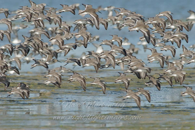 "Shorebirds in flight 1 © 2008 Nova Mackentley Laguna Atascosa NWR, TX SIF1  <div class=""ss-paypal-button""><div class=""ss-paypal-add-to-cart-section""><div class=""ss-paypal-product-options""><h4>Mat Sizes</h4><ul><li><a href=""https://www.paypal.com/cgi-bin/webscr?cmd=_cart&business=T77V5VKCW4K2U&lc=US&item_name=Shorebirds%20in%20flight%201%20%C2%A9%202008%20Nova%20Mackentley%20Laguna%20Atascosa%20NWR%2C%20TX%20SIF1&item_number=http%3A%2F%2Fwww.nightflightimages.com%2FGalleries-1%2FShore%2Fi-6Rt64HS&button_subtype=products&no_note=0&cn=Add%20special%20instructions%20to%20the%20seller%3A&no_shipping=2&currency_code=USD&weight_unit=lbs&add=1&bn=PP-ShopCartBF%3Abtn_cart_SM.gif%3ANonHosted&on0=Mat%20Sizes&option_select0=5%20x%207&option_amount0=10.00&option_select1=8%20x%2010&option_amount1=18.00&option_select2=11%20x%2014&option_amount2=28.00&option_select3=card&option_amount3=4.00&option_index=0&charset=utf-8&submit=&os0=5%20x%207"" target=""paypal""><span>5 x 7 $11.00 USD</span><img src=""https://www.paypalobjects.com/en_US/i/btn/btn_cart_SM.gif""></a></li><li><a href=""https://www.paypal.com/cgi-bin/webscr?cmd=_cart&business=T77V5VKCW4K2U&lc=US&item_name=Shorebirds%20in%20flight%201%20%C2%A9%202008%20Nova%20Mackentley%20Laguna%20Atascosa%20NWR%2C%20TX%20SIF1&item_number=http%3A%2F%2Fwww.nightflightimages.com%2FGalleries-1%2FShore%2Fi-6Rt64HS&button_subtype=products&no_note=0&cn=Add%20special%20instructions%20to%20the%20seller%3A&no_shipping=2&currency_code=USD&weight_unit=lbs&add=1&bn=PP-ShopCartBF%3Abtn_cart_SM.gif%3ANonHosted&on0=Mat%20Sizes&option_select0=5%20x%207&option_amount0=10.00&option_select1=8%20x%2010&option_amount1=18.00&option_select2=11%20x%2014&option_amount2=28.00&option_select3=card&option_amount3=4.00&option_index=0&charset=utf-8&submit=&os0=8%20x%2010"" target=""paypal""><span>8 x 10 $19.00 USD</span><img src=""https://www.paypalobjects.com/en_US/i/btn/btn_cart_SM.gif""></a></li><li><a href=""https://www.paypal.com/cgi-bin/webscr?cmd=_cart&business=T77V5VKCW4K2U&lc=US&item_name=Shorebirds%20in%20flight%201%20%C2%A9%202008%20Nova%20Mackentley%20Laguna%20Atascosa%20NWR%2C%20TX%20SIF1&item_number=http%3A%2F%2Fwww.nightflightimages.com%2FGalleries-1%2FShore%2Fi-6Rt64HS&button_subtype=products&no_note=0&cn=Add%20special%20instructions%20to%20the%20seller%3A&no_shipping=2&currency_code=USD&weight_unit=lbs&add=1&bn=PP-ShopCartBF%3Abtn_cart_SM.gif%3ANonHosted&on0=Mat%20Sizes&option_select0=5%20x%207&option_amount0=10.00&option_select1=8%20x%2010&option_amount1=18.00&option_select2=11%20x%2014&option_amount2=28.00&option_select3=card&option_amount3=4.00&option_index=0&charset=utf-8&submit=&os0=11%20x%2014"" target=""paypal""><span>11 x 14 $29.00 USD</span><img src=""https://www.paypalobjects.com/en_US/i/btn/btn_cart_SM.gif""></a></li><li><a href=""https://www.paypal.com/cgi-bin/webscr?cmd=_cart&business=T77V5VKCW4K2U&lc=US&item_name=Shorebirds%20in%20flight%201%20%C2%A9%202008%20Nova%20Mackentley%20Laguna%20Atascosa%20NWR%2C%20TX%20SIF1&item_number=http%3A%2F%2Fwww.nightflightimages.com%2FGalleries-1%2FShore%2Fi-6Rt64HS&button_subtype=products&no_note=0&cn=Add%20special%20instructions%20to%20the%20seller%3A&no_shipping=2&currency_code=USD&weight_unit=lbs&add=1&bn=PP-ShopCartBF%3Abtn_cart_SM.gif%3ANonHosted&on0=Mat%20Sizes&option_select0=5%20x%207&option_amount0=10.00&option_select1=8%20x%2010&option_amount1=18.00&option_select2=11%20x%2014&option_amount2=28.00&option_select3=card&option_amount3=4.00&option_index=0&charset=utf-8&submit=&os0=card"" target=""paypal""><span>card $5.00 USD</span><img src=""https://www.paypalobjects.com/en_US/i/btn/btn_cart_SM.gif""></a></li></ul></div></div> <div class=""ss-paypal-view-cart-section""><a href=""https://www.paypal.com/cgi-bin/webscr?cmd=_cart&business=T77V5VKCW4K2U&display=1&item_name=Shorebirds%20in%20flight%201%20%C2%A9%202008%20Nova%20Mackentley%20Laguna%20Atascosa%20NWR%2C%20TX%20SIF1&item_number=http%3A%2F%2Fwww.nightflightimages.com%2FGalleries-1%2FShore%2Fi-6Rt64HS&charset=utf-8&submit="" target=""paypal"" class=""ss-paypal-submit-button""><img src=""https://www.paypalobjects.com/en_US/i/btn/btn_viewcart_LG.gif""></a></div></div><div class=""ss-paypal-button-end""></div>"
