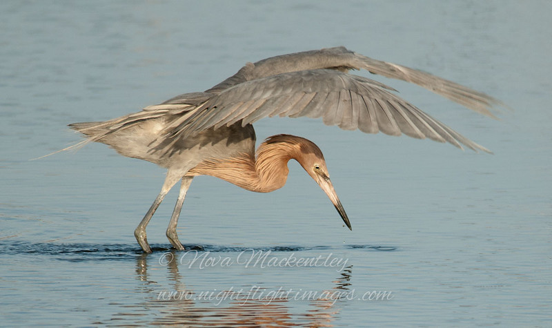 "Reddish Egret fishing © 2010 Nova Mackentley South Padre Island, TX REF  <div class=""ss-paypal-button""> <div class=""ss-paypal-add-to-cart-section""><div class=""ss-paypal-product-options""> <h4>Mat Sizes</h4> <ul> <li><a href=""https://www.paypal.com/cgi-bin/webscr?cmd=_cart&amp;business=T77V5VKCW4K2U&amp;lc=US&amp;item_name=Reddish%20Egret%20fishing%20%C2%A9%202010%20Nova%20Mackentley%20South%20Padre%20Island%2C%20TX%20REF&amp;item_number=http%3A%2F%2Fwww.nightflightimages.com%2FGalleries-1%2FLower-Rio-Grande-Valley-TX%2Fi-7S9XJv2&amp;button_subtype=products&amp;no_note=0&amp;cn=Add%20special%20instructions%20to%20the%20seller%3A&amp;no_shipping=2&amp;currency_code=USD&amp;weight_unit=lbs&amp;add=1&amp;bn=PP-ShopCartBF%3Abtn_cart_SM.gif%3ANonHosted&amp;on0=Mat%20Sizes&amp;option_select0=5%20x%207&amp;option_amount0=10.00&amp;option_select1=8%20x%2010&amp;option_amount1=18.00&amp;option_select2=11%20x%2014&amp;option_amount2=28.00&amp;option_select3=card&amp;option_amount3=4.00&amp;option_index=0&amp;submit=&amp;os0=5%20x%207"" target=""paypal""><span>5 x 7 $10.00 USD</span><img src=""https://www.paypalobjects.com/en_US/i/btn/btn_cart_SM.gif""></a></li> <li><a href=""https://www.paypal.com/cgi-bin/webscr?cmd=_cart&amp;business=T77V5VKCW4K2U&amp;lc=US&amp;item_name=Reddish%20Egret%20fishing%20%C2%A9%202010%20Nova%20Mackentley%20South%20Padre%20Island%2C%20TX%20REF&amp;item_number=http%3A%2F%2Fwww.nightflightimages.com%2FGalleries-1%2FLower-Rio-Grande-Valley-TX%2Fi-7S9XJv2&amp;button_subtype=products&amp;no_note=0&amp;cn=Add%20special%20instructions%20to%20the%20seller%3A&amp;no_shipping=2&amp;currency_code=USD&amp;weight_unit=lbs&amp;add=1&amp;bn=PP-ShopCartBF%3Abtn_cart_SM.gif%3ANonHosted&amp;on0=Mat%20Sizes&amp;option_select0=5%20x%207&amp;option_amount0=10.00&amp;option_select1=8%20x%2010&amp;option_amount1=18.00&amp;option_select2=11%20x%2014&amp;option_amount2=28.00&amp;option_select3=card&amp;option_amount3=4.00&amp;option_index=0&amp;submit=&amp;os0=8%20x%2010"" target=""paypal""><span>8 x 10 $18.00 USD</span><img src=""https://www.paypalobjects.com/en_US/i/btn/btn_cart_SM.gif""></a></li> <li><a href=""https://www.paypal.com/cgi-bin/webscr?cmd=_cart&amp;business=T77V5VKCW4K2U&amp;lc=US&amp;item_name=Reddish%20Egret%20fishing%20%C2%A9%202010%20Nova%20Mackentley%20South%20Padre%20Island%2C%20TX%20REF&amp;item_number=http%3A%2F%2Fwww.nightflightimages.com%2FGalleries-1%2FLower-Rio-Grande-Valley-TX%2Fi-7S9XJv2&amp;button_subtype=products&amp;no_note=0&amp;cn=Add%20special%20instructions%20to%20the%20seller%3A&amp;no_shipping=2&amp;currency_code=USD&amp;weight_unit=lbs&amp;add=1&amp;bn=PP-ShopCartBF%3Abtn_cart_SM.gif%3ANonHosted&amp;on0=Mat%20Sizes&amp;option_select0=5%20x%207&amp;option_amount0=10.00&amp;option_select1=8%20x%2010&amp;option_amount1=18.00&amp;option_select2=11%20x%2014&amp;option_amount2=28.00&amp;option_select3=card&amp;option_amount3=4.00&amp;option_index=0&amp;submit=&amp;os0=11%20x%2014"" target=""paypal""><span>11 x 14 $28.00 USD</span><img src=""https://www.paypalobjects.com/en_US/i/btn/btn_cart_SM.gif""></a></li> <li><a href=""https://www.paypal.com/cgi-bin/webscr?cmd=_cart&amp;business=T77V5VKCW4K2U&amp;lc=US&amp;item_name=Reddish%20Egret%20fishing%20%C2%A9%202010%20Nova%20Mackentley%20South%20Padre%20Island%2C%20TX%20REF&amp;item_number=http%3A%2F%2Fwww.nightflightimages.com%2FGalleries-1%2FLower-Rio-Grande-Valley-TX%2Fi-7S9XJv2&amp;button_subtype=products&amp;no_note=0&amp;cn=Add%20special%20instructions%20to%20the%20seller%3A&amp;no_shipping=2&amp;currency_code=USD&amp;weight_unit=lbs&amp;add=1&amp;bn=PP-ShopCartBF%3Abtn_cart_SM.gif%3ANonHosted&amp;on0=Mat%20Sizes&amp;option_select0=5%20x%207&amp;option_amount0=10.00&amp;option_select1=8%20x%2010&amp;option_amount1=18.00&amp;option_select2=11%20x%2014&amp;option_amount2=28.00&amp;option_select3=card&amp;option_amount3=4.00&amp;option_index=0&amp;submit=&amp;os0=card"" target=""paypal""><span>card $4.00 USD</span><img src=""https://www.paypalobjects.com/en_US/i/btn/btn_cart_SM.gif""></a></li> </ul> </div></div> <div class=""ss-paypal-view-cart-section""><a href=""https://www.paypal.com/cgi-bin/webscr?cmd=_cart&amp;business=T77V5VKCW4K2U&amp;display=1&amp;item_name=Reddish%20Egret%20fishing%20%C2%A9%202010%20Nova%20Mackentley%20South%20Padre%20Island%2C%20TX%20REF&amp;item_number=http%3A%2F%2Fwww.nightflightimages.com%2FGalleries-1%2FLower-Rio-Grande-Valley-TX%2Fi-7S9XJv2&amp;submit="" target=""paypal"" class=""ss-paypal-submit-button""><img src=""https://www.paypalobjects.com/en_US/i/btn/btn_viewcart_LG.gif""></a></div> </div><div class=""ss-paypal-button-end"" style=""""></div>"
