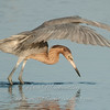 "Reddish Egret fishing © 2010 Nova Mackentley South Padre Island, TX REF  <div class=""ss-paypal-button""> <div class=""ss-paypal-add-to-cart-section""><div class=""ss-paypal-product-options""> <h4>Mat Sizes</h4> <ul> <li><a href=""https://www.paypal.com/cgi-bin/webscr?cmd=_cart&business=T77V5VKCW4K2U&lc=US&item_name=Reddish%20Egret%20fishing%20%C2%A9%202010%20Nova%20Mackentley%20South%20Padre%20Island%2C%20TX%20REF&item_number=http%3A%2F%2Fwww.nightflightimages.com%2FGalleries-1%2FLower-Rio-Grande-Valley-TX%2Fi-7S9XJv2&button_subtype=products&no_note=0&cn=Add%20special%20instructions%20to%20the%20seller%3A&no_shipping=2&currency_code=USD&weight_unit=lbs&add=1&bn=PP-ShopCartBF%3Abtn_cart_SM.gif%3ANonHosted&on0=Mat%20Sizes&option_select0=5%20x%207&option_amount0=10.00&option_select1=8%20x%2010&option_amount1=18.00&option_select2=11%20x%2014&option_amount2=28.00&option_select3=card&option_amount3=4.00&option_index=0&submit=&os0=5%20x%207"" target=""paypal""><span>5 x 7 $10.00 USD</span><img src=""https://www.paypalobjects.com/en_US/i/btn/btn_cart_SM.gif""></a></li> <li><a href=""https://www.paypal.com/cgi-bin/webscr?cmd=_cart&business=T77V5VKCW4K2U&lc=US&item_name=Reddish%20Egret%20fishing%20%C2%A9%202010%20Nova%20Mackentley%20South%20Padre%20Island%2C%20TX%20REF&item_number=http%3A%2F%2Fwww.nightflightimages.com%2FGalleries-1%2FLower-Rio-Grande-Valley-TX%2Fi-7S9XJv2&button_subtype=products&no_note=0&cn=Add%20special%20instructions%20to%20the%20seller%3A&no_shipping=2&currency_code=USD&weight_unit=lbs&add=1&bn=PP-ShopCartBF%3Abtn_cart_SM.gif%3ANonHosted&on0=Mat%20Sizes&option_select0=5%20x%207&option_amount0=10.00&option_select1=8%20x%2010&option_amount1=18.00&option_select2=11%20x%2014&option_amount2=28.00&option_select3=card&option_amount3=4.00&option_index=0&submit=&os0=8%20x%2010"" target=""paypal""><span>8 x 10 $18.00 USD</span><img src=""https://www.paypalobjects.com/en_US/i/btn/btn_cart_SM.gif""></a></li> <li><a href=""https://www.paypal.com/cgi-bin/webscr?cmd=_cart&business=T77V5VKCW4K2U&lc=US&item_name=Reddish%20Egret%20fishing%20%C2%A9%202010%20Nova%20Mackentley%20South%20Padre%20Island%2C%20TX%20REF&item_number=http%3A%2F%2Fwww.nightflightimages.com%2FGalleries-1%2FLower-Rio-Grande-Valley-TX%2Fi-7S9XJv2&button_subtype=products&no_note=0&cn=Add%20special%20instructions%20to%20the%20seller%3A&no_shipping=2&currency_code=USD&weight_unit=lbs&add=1&bn=PP-ShopCartBF%3Abtn_cart_SM.gif%3ANonHosted&on0=Mat%20Sizes&option_select0=5%20x%207&option_amount0=10.00&option_select1=8%20x%2010&option_amount1=18.00&option_select2=11%20x%2014&option_amount2=28.00&option_select3=card&option_amount3=4.00&option_index=0&submit=&os0=11%20x%2014"" target=""paypal""><span>11 x 14 $28.00 USD</span><img src=""https://www.paypalobjects.com/en_US/i/btn/btn_cart_SM.gif""></a></li> <li><a href=""https://www.paypal.com/cgi-bin/webscr?cmd=_cart&business=T77V5VKCW4K2U&lc=US&item_name=Reddish%20Egret%20fishing%20%C2%A9%202010%20Nova%20Mackentley%20South%20Padre%20Island%2C%20TX%20REF&item_number=http%3A%2F%2Fwww.nightflightimages.com%2FGalleries-1%2FLower-Rio-Grande-Valley-TX%2Fi-7S9XJv2&button_subtype=products&no_note=0&cn=Add%20special%20instructions%20to%20the%20seller%3A&no_shipping=2&currency_code=USD&weight_unit=lbs&add=1&bn=PP-ShopCartBF%3Abtn_cart_SM.gif%3ANonHosted&on0=Mat%20Sizes&option_select0=5%20x%207&option_amount0=10.00&option_select1=8%20x%2010&option_amount1=18.00&option_select2=11%20x%2014&option_amount2=28.00&option_select3=card&option_amount3=4.00&option_index=0&submit=&os0=card"" target=""paypal""><span>card $4.00 USD</span><img src=""https://www.paypalobjects.com/en_US/i/btn/btn_cart_SM.gif""></a></li> </ul> </div></div> <div class=""ss-paypal-view-cart-section""><a href=""https://www.paypal.com/cgi-bin/webscr?cmd=_cart&business=T77V5VKCW4K2U&display=1&item_name=Reddish%20Egret%20fishing%20%C2%A9%202010%20Nova%20Mackentley%20South%20Padre%20Island%2C%20TX%20REF&item_number=http%3A%2F%2Fwww.nightflightimages.com%2FGalleries-1%2FLower-Rio-Grande-Valley-TX%2Fi-7S9XJv2&submit="" target=""paypal"" class=""ss-paypal-submit-button""><img src=""https://www.paypalobjects.com/en_US/i/btn/btn_viewcart_LG.gif""></a></div> </div><div class=""ss-paypal-button-end"" style=""""></div>"
