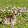 """Cottontail  © 2010 C. M. Neri. Laguna Atascosa NWR, TX RABBIT  <div class=""""ss-paypal-button""""><div class=""""ss-paypal-add-to-cart-section""""><div class=""""ss-paypal-product-options""""><h4>Mat Sizes</h4><ul><li><a href=""""https://www.paypal.com/cgi-bin/webscr?cmd=_cart&amp;business=T77V5VKCW4K2U&amp;lc=US&amp;item_name=Cottontail%20%20%C2%A9%202010%20C.%20M.%20Neri.%20Laguna%20Atascosa%20NWR%2C%20TX%20RABBIT&amp;item_number=http%3A%2F%2Fwww.nightflightimages.com%2FGalleries-1%2FMammals%2Fi-7qqdpk9&amp;button_subtype=products&amp;no_note=0&amp;cn=Add%20special%20instructions%20to%20the%20seller%3A&amp;no_shipping=2&amp;currency_code=USD&amp;weight_unit=lbs&amp;add=1&amp;bn=PP-ShopCartBF%3Abtn_cart_SM.gif%3ANonHosted&amp;on0=Mat%20Sizes&amp;option_select0=5%20x%207&amp;option_amount0=10.00&amp;option_select1=8%20x%2010&amp;option_amount1=18.00&amp;option_select2=11%20x%2014&amp;option_amount2=28.00&amp;option_select3=card&amp;option_amount3=4.00&amp;option_index=0&amp;charset=utf-8&amp;submit=&amp;os0=5%20x%207"""" target=""""paypal""""><span>5 x 7 $11.00 USD</span><img src=""""https://www.paypalobjects.com/en_US/i/btn/btn_cart_SM.gif""""></a></li><li><a href=""""https://www.paypal.com/cgi-bin/webscr?cmd=_cart&amp;business=T77V5VKCW4K2U&amp;lc=US&amp;item_name=Cottontail%20%20%C2%A9%202010%20C.%20M.%20Neri.%20Laguna%20Atascosa%20NWR%2C%20TX%20RABBIT&amp;item_number=http%3A%2F%2Fwww.nightflightimages.com%2FGalleries-1%2FMammals%2Fi-7qqdpk9&amp;button_subtype=products&amp;no_note=0&amp;cn=Add%20special%20instructions%20to%20the%20seller%3A&amp;no_shipping=2&amp;currency_code=USD&amp;weight_unit=lbs&amp;add=1&amp;bn=PP-ShopCartBF%3Abtn_cart_SM.gif%3ANonHosted&amp;on0=Mat%20Sizes&amp;option_select0=5%20x%207&amp;option_amount0=10.00&amp;option_select1=8%20x%2010&amp;option_amount1=18.00&amp;option_select2=11%20x%2014&amp;option_amount2=28.00&amp;option_select3=card&amp;option_amount3=4.00&amp;option_index=0&amp;charset=utf-8&amp;submit=&amp;os0=8%20x%2010"""" target=""""paypal""""><span>8 x 10 $19.00 USD</span"""