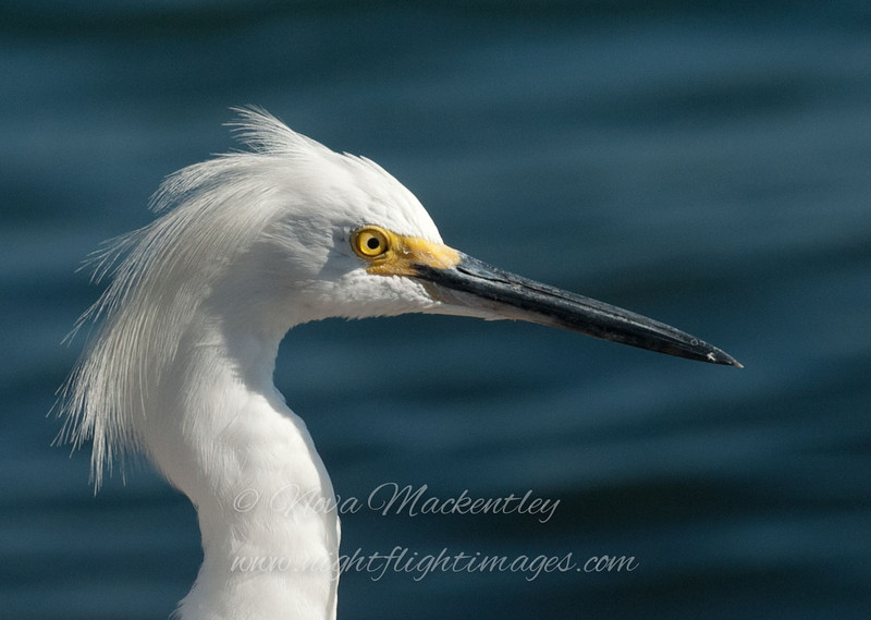 "Snowy Egret © 2010 Nova Mackentley South Padre Island, TX SEH  <div class=""ss-paypal-button""> <div class=""ss-paypal-add-to-cart-section""><div class=""ss-paypal-product-options""> <h4>Mat Sizes</h4> <ul> <li><a href=""https://www.paypal.com/cgi-bin/webscr?cmd=_cart&amp;business=T77V5VKCW4K2U&amp;lc=US&amp;item_name=Snowy%20Egret%20%C2%A9%202010%20Nova%20Mackentley%20South%20Padre%20Island%2C%20TX%20SEH&amp;item_number=http%3A%2F%2Fwww.nightflightimages.com%2FGalleries-1%2FLower-Rio-Grande-Valley-TX%2Fi-96ZVDx7&amp;button_subtype=products&amp;no_note=0&amp;cn=Add%20special%20instructions%20to%20the%20seller%3A&amp;no_shipping=2&amp;currency_code=USD&amp;weight_unit=lbs&amp;add=1&amp;bn=PP-ShopCartBF%3Abtn_cart_SM.gif%3ANonHosted&amp;on0=Mat%20Sizes&amp;option_select0=5%20x%207&amp;option_amount0=10.00&amp;option_select1=8%20x%2010&amp;option_amount1=18.00&amp;option_select2=11%20x%2014&amp;option_amount2=28.00&amp;option_select3=card&amp;option_amount3=4.00&amp;option_index=0&amp;submit=&amp;os0=5%20x%207"" target=""paypal""><span>5 x 7 $10.00 USD</span><img src=""https://www.paypalobjects.com/en_US/i/btn/btn_cart_SM.gif""></a></li> <li><a href=""https://www.paypal.com/cgi-bin/webscr?cmd=_cart&amp;business=T77V5VKCW4K2U&amp;lc=US&amp;item_name=Snowy%20Egret%20%C2%A9%202010%20Nova%20Mackentley%20South%20Padre%20Island%2C%20TX%20SEH&amp;item_number=http%3A%2F%2Fwww.nightflightimages.com%2FGalleries-1%2FLower-Rio-Grande-Valley-TX%2Fi-96ZVDx7&amp;button_subtype=products&amp;no_note=0&amp;cn=Add%20special%20instructions%20to%20the%20seller%3A&amp;no_shipping=2&amp;currency_code=USD&amp;weight_unit=lbs&amp;add=1&amp;bn=PP-ShopCartBF%3Abtn_cart_SM.gif%3ANonHosted&amp;on0=Mat%20Sizes&amp;option_select0=5%20x%207&amp;option_amount0=10.00&amp;option_select1=8%20x%2010&amp;option_amount1=18.00&amp;option_select2=11%20x%2014&amp;option_amount2=28.00&amp;option_select3=card&amp;option_amount3=4.00&amp;option_index=0&amp;submit=&amp;os0=8%20x%2010"" target=""paypal""><span>8 x 10 $18.00 USD</span><img src=""https://www.paypalobjects.com/en_US/i/btn/btn_cart_SM.gif""></a></li> <li><a href=""https://www.paypal.com/cgi-bin/webscr?cmd=_cart&amp;business=T77V5VKCW4K2U&amp;lc=US&amp;item_name=Snowy%20Egret%20%C2%A9%202010%20Nova%20Mackentley%20South%20Padre%20Island%2C%20TX%20SEH&amp;item_number=http%3A%2F%2Fwww.nightflightimages.com%2FGalleries-1%2FLower-Rio-Grande-Valley-TX%2Fi-96ZVDx7&amp;button_subtype=products&amp;no_note=0&amp;cn=Add%20special%20instructions%20to%20the%20seller%3A&amp;no_shipping=2&amp;currency_code=USD&amp;weight_unit=lbs&amp;add=1&amp;bn=PP-ShopCartBF%3Abtn_cart_SM.gif%3ANonHosted&amp;on0=Mat%20Sizes&amp;option_select0=5%20x%207&amp;option_amount0=10.00&amp;option_select1=8%20x%2010&amp;option_amount1=18.00&amp;option_select2=11%20x%2014&amp;option_amount2=28.00&amp;option_select3=card&amp;option_amount3=4.00&amp;option_index=0&amp;submit=&amp;os0=11%20x%2014"" target=""paypal""><span>11 x 14 $28.00 USD</span><img src=""https://www.paypalobjects.com/en_US/i/btn/btn_cart_SM.gif""></a></li> <li><a href=""https://www.paypal.com/cgi-bin/webscr?cmd=_cart&amp;business=T77V5VKCW4K2U&amp;lc=US&amp;item_name=Snowy%20Egret%20%C2%A9%202010%20Nova%20Mackentley%20South%20Padre%20Island%2C%20TX%20SEH&amp;item_number=http%3A%2F%2Fwww.nightflightimages.com%2FGalleries-1%2FLower-Rio-Grande-Valley-TX%2Fi-96ZVDx7&amp;button_subtype=products&amp;no_note=0&amp;cn=Add%20special%20instructions%20to%20the%20seller%3A&amp;no_shipping=2&amp;currency_code=USD&amp;weight_unit=lbs&amp;add=1&amp;bn=PP-ShopCartBF%3Abtn_cart_SM.gif%3ANonHosted&amp;on0=Mat%20Sizes&amp;option_select0=5%20x%207&amp;option_amount0=10.00&amp;option_select1=8%20x%2010&amp;option_amount1=18.00&amp;option_select2=11%20x%2014&amp;option_amount2=28.00&amp;option_select3=card&amp;option_amount3=4.00&amp;option_index=0&amp;submit=&amp;os0=card"" target=""paypal""><span>card $4.00 USD</span><img src=""https://www.paypalobjects.com/en_US/i/btn/btn_cart_SM.gif""></a></li> </ul> </div></div> <div class=""ss-paypal-view-cart-section""><a href=""https://www.paypal.com/cgi-bin/webscr?cmd=_cart&amp;business=T77V5VKCW4K2U&amp;display=1&amp;item_name=Snowy%20Egret%20%C2%A9%202010%20Nova%20Mackentley%20South%20Padre%20Island%2C%20TX%20SEH&amp;item_number=http%3A%2F%2Fwww.nightflightimages.com%2FGalleries-1%2FLower-Rio-Grande-Valley-TX%2Fi-96ZVDx7&amp;submit="" target=""paypal"" class=""ss-paypal-submit-button""><img src=""https://www.paypalobjects.com/en_US/i/btn/btn_viewcart_LG.gif""></a></div> </div><div class=""ss-paypal-button-end"" style=""""></div>"