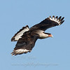 "Crested Caracara © 2010 C. M. Neri.  Laguna Atascosa NWR, TX. CRCA  <div class=""ss-paypal-button""><div class=""ss-paypal-add-to-cart-section""><div class=""ss-paypal-product-options""><h4>Mat Sizes</h4><ul><li><a href=""https://www.paypal.com/cgi-bin/webscr?cmd=_cart&business=T77V5VKCW4K2U&lc=US&item_name=Crested%20Caracara%20%C2%A9%202010%20C.%20M.%20Neri.%20%20Laguna%20Atascosa%20NWR%2C%20TX.%20CRCA&item_number=http%3A%2F%2Fwww.nightflightimages.com%2FGalleries-1%2FHawks%2Fi-9xcQChN&button_subtype=products&no_note=0&cn=Add%20special%20instructions%20to%20the%20seller%3A&no_shipping=2&currency_code=USD&weight_unit=lbs&add=1&bn=PP-ShopCartBF%3Abtn_cart_SM.gif%3ANonHosted&on0=Mat%20Sizes&option_select0=5%20x%207&option_amount0=10.00&option_select1=8%20x%2010&option_amount1=18.00&option_select2=11%20x%2014&option_amount2=28.00&option_select3=card&option_amount3=4.00&option_index=0&charset=utf-8&submit=&os0=5%20x%207"" target=""paypal""><span>5 x 7 $11.00 USD</span><img src=""https://www.paypalobjects.com/en_US/i/btn/btn_cart_SM.gif""></a></li><li><a href=""https://www.paypal.com/cgi-bin/webscr?cmd=_cart&business=T77V5VKCW4K2U&lc=US&item_name=Crested%20Caracara%20%C2%A9%202010%20C.%20M.%20Neri.%20%20Laguna%20Atascosa%20NWR%2C%20TX.%20CRCA&item_number=http%3A%2F%2Fwww.nightflightimages.com%2FGalleries-1%2FHawks%2Fi-9xcQChN&button_subtype=products&no_note=0&cn=Add%20special%20instructions%20to%20the%20seller%3A&no_shipping=2&currency_code=USD&weight_unit=lbs&add=1&bn=PP-ShopCartBF%3Abtn_cart_SM.gif%3ANonHosted&on0=Mat%20Sizes&option_select0=5%20x%207&option_amount0=10.00&option_select1=8%20x%2010&option_amount1=18.00&option_select2=11%20x%2014&option_amount2=28.00&option_select3=card&option_amount3=4.00&option_index=0&charset=utf-8&submit=&os0=8%20x%2010"" target=""paypal""><span>8 x 10 $19.00 USD</span><img src=""https://www.paypalobjects.com/en_US/i/btn/btn_cart_SM.gif""></a></li><li><a href=""https://www.paypal.com/cgi-bin/webscr?cmd=_cart&business=T77V5VKCW4K2U&lc=US&item_name=Crested%20Caracara%20%C2%A9%202010%20C.%20M.%20Neri.%20%20Laguna%20Atascosa%20NWR%2C%20TX.%20CRCA&item_number=http%3A%2F%2Fwww.nightflightimages.com%2FGalleries-1%2FHawks%2Fi-9xcQChN&button_subtype=products&no_note=0&cn=Add%20special%20instructions%20to%20the%20seller%3A&no_shipping=2&currency_code=USD&weight_unit=lbs&add=1&bn=PP-ShopCartBF%3Abtn_cart_SM.gif%3ANonHosted&on0=Mat%20Sizes&option_select0=5%20x%207&option_amount0=10.00&option_select1=8%20x%2010&option_amount1=18.00&option_select2=11%20x%2014&option_amount2=28.00&option_select3=card&option_amount3=4.00&option_index=0&charset=utf-8&submit=&os0=11%20x%2014"" target=""paypal""><span>11 x 14 $29.00 USD</span><img src=""https://www.paypalobjects.com/en_US/i/btn/btn_cart_SM.gif""></a></li><li><a href=""https://www.paypal.com/cgi-bin/webscr?cmd=_cart&business=T77V5VKCW4K2U&lc=US&item_name=Crested%20Caracara%20%C2%A9%202010%20C.%20M.%20Neri.%20%20Laguna%20Atascosa%20NWR%2C%20TX.%20CRCA&item_number=http%3A%2F%2Fwww.nightflightimages.com%2FGalleries-1%2FHawks%2Fi-9xcQChN&button_subtype=products&no_note=0&cn=Add%20special%20instructions%20to%20the%20seller%3A&no_shipping=2&currency_code=USD&weight_unit=lbs&add=1&bn=PP-ShopCartBF%3Abtn_cart_SM.gif%3ANonHosted&on0=Mat%20Sizes&option_select0=5%20x%207&option_amount0=10.00&option_select1=8%20x%2010&option_amount1=18.00&option_select2=11%20x%2014&option_amount2=28.00&option_select3=card&option_amount3=4.00&option_index=0&charset=utf-8&submit=&os0=card"" target=""paypal""><span>card $5.00 USD</span><img src=""https://www.paypalobjects.com/en_US/i/btn/btn_cart_SM.gif""></a></li></ul></div></div> <div class=""ss-paypal-view-cart-section""><a href=""https://www.paypal.com/cgi-bin/webscr?cmd=_cart&business=T77V5VKCW4K2U&display=1&item_name=Crested%20Caracara%20%C2%A9%202010%20C.%20M.%20Neri.%20%20Laguna%20Atascosa%20NWR%2C%20TX.%20CRCA&item_number=http%3A%2F%2Fwww.nightflightimages.com%2FGalleries-1%2FHawks%2Fi-9xcQChN&charset=utf-8&submit="" target=""paypal"" class=""ss-paypal-submit-button""><img src=""https://www.paypalobjects.com/en_US/i/btn/btn_viewcart_LG.gif""></a></div></div><div class=""ss-paypal-button-end""></div>"