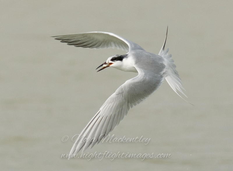 "Forster's Tern with fish © 2009 Nova Mackentley Laguna Atascosa NWR, TX FTF  <div class=""ss-paypal-button""><div class=""ss-paypal-add-to-cart-section""><div class=""ss-paypal-product-options""><h4>Mat Sizes</h4><ul><li><a href=""https://www.paypal.com/cgi-bin/webscr?cmd=_cart&amp;business=T77V5VKCW4K2U&amp;lc=US&amp;item_name=Forster's%20Tern%20with%20fish%20%C2%A9%202009%20Nova%20Mackentley%20Laguna%20Atascosa%20NWR%2C%20TX%20FTF&amp;item_number=http%3A%2F%2Fwww.nightflightimages.com%2FGalleries-1%2FOur-Favorites%2Fi-Cbv5TS2&amp;button_subtype=products&amp;no_note=0&amp;cn=Add%20special%20instructions%20to%20the%20seller%3A&amp;no_shipping=2&amp;currency_code=USD&amp;weight_unit=lbs&amp;add=1&amp;bn=PP-ShopCartBF%3Abtn_cart_SM.gif%3ANonHosted&amp;on0=Mat%20Sizes&amp;option_select0=5%20x%207&amp;option_amount0=10.00&amp;option_select1=8%20x%2010&amp;option_amount1=18.00&amp;option_select2=11%20x%2014&amp;option_amount2=28.00&amp;option_select3=card&amp;option_amount3=4.00&amp;option_index=0&amp;charset=utf-8&amp;submit=&amp;os0=5%20x%207"" target=""paypal""><span>5 x 7 $11.00 USD</span><img src=""https://www.paypalobjects.com/en_US/i/btn/btn_cart_SM.gif""></a></li><li><a href=""https://www.paypal.com/cgi-bin/webscr?cmd=_cart&amp;business=T77V5VKCW4K2U&amp;lc=US&amp;item_name=Forster's%20Tern%20with%20fish%20%C2%A9%202009%20Nova%20Mackentley%20Laguna%20Atascosa%20NWR%2C%20TX%20FTF&amp;item_number=http%3A%2F%2Fwww.nightflightimages.com%2FGalleries-1%2FOur-Favorites%2Fi-Cbv5TS2&amp;button_subtype=products&amp;no_note=0&amp;cn=Add%20special%20instructions%20to%20the%20seller%3A&amp;no_shipping=2&amp;currency_code=USD&amp;weight_unit=lbs&amp;add=1&amp;bn=PP-ShopCartBF%3Abtn_cart_SM.gif%3ANonHosted&amp;on0=Mat%20Sizes&amp;option_select0=5%20x%207&amp;option_amount0=10.00&amp;option_select1=8%20x%2010&amp;option_amount1=18.00&amp;option_select2=11%20x%2014&amp;option_amount2=28.00&amp;option_select3=card&amp;option_amount3=4.00&amp;option_index=0&amp;charset=utf-8&amp;submit=&amp;os0=8%20x%2010"" target=""paypal""><span>8 x 10 $19.00 USD</span><img src=""https://www.paypalobjects.com/en_US/i/btn/btn_cart_SM.gif""></a></li><li><a href=""https://www.paypal.com/cgi-bin/webscr?cmd=_cart&amp;business=T77V5VKCW4K2U&amp;lc=US&amp;item_name=Forster's%20Tern%20with%20fish%20%C2%A9%202009%20Nova%20Mackentley%20Laguna%20Atascosa%20NWR%2C%20TX%20FTF&amp;item_number=http%3A%2F%2Fwww.nightflightimages.com%2FGalleries-1%2FOur-Favorites%2Fi-Cbv5TS2&amp;button_subtype=products&amp;no_note=0&amp;cn=Add%20special%20instructions%20to%20the%20seller%3A&amp;no_shipping=2&amp;currency_code=USD&amp;weight_unit=lbs&amp;add=1&amp;bn=PP-ShopCartBF%3Abtn_cart_SM.gif%3ANonHosted&amp;on0=Mat%20Sizes&amp;option_select0=5%20x%207&amp;option_amount0=10.00&amp;option_select1=8%20x%2010&amp;option_amount1=18.00&amp;option_select2=11%20x%2014&amp;option_amount2=28.00&amp;option_select3=card&amp;option_amount3=4.00&amp;option_index=0&amp;charset=utf-8&amp;submit=&amp;os0=11%20x%2014"" target=""paypal""><span>11 x 14 $29.00 USD</span><img src=""https://www.paypalobjects.com/en_US/i/btn/btn_cart_SM.gif""></a></li><li><a href=""https://www.paypal.com/cgi-bin/webscr?cmd=_cart&amp;business=T77V5VKCW4K2U&amp;lc=US&amp;item_name=Forster's%20Tern%20with%20fish%20%C2%A9%202009%20Nova%20Mackentley%20Laguna%20Atascosa%20NWR%2C%20TX%20FTF&amp;item_number=http%3A%2F%2Fwww.nightflightimages.com%2FGalleries-1%2FOur-Favorites%2Fi-Cbv5TS2&amp;button_subtype=products&amp;no_note=0&amp;cn=Add%20special%20instructions%20to%20the%20seller%3A&amp;no_shipping=2&amp;currency_code=USD&amp;weight_unit=lbs&amp;add=1&amp;bn=PP-ShopCartBF%3Abtn_cart_SM.gif%3ANonHosted&amp;on0=Mat%20Sizes&amp;option_select0=5%20x%207&amp;option_amount0=10.00&amp;option_select1=8%20x%2010&amp;option_amount1=18.00&amp;option_select2=11%20x%2014&amp;option_amount2=28.00&amp;option_select3=card&amp;option_amount3=4.00&amp;option_index=0&amp;charset=utf-8&amp;submit=&amp;os0=card"" target=""paypal""><span>card $5.00 USD</span><img src=""https://www.paypalobjects.com/en_US/i/btn/btn_cart_SM.gif""></a></li></ul></div></div> <div class=""ss-paypal-view-cart-section""><a href=""https://www.paypal.com/cgi-bin/webscr?cmd=_cart&amp;business=T77V5VKCW4K2U&amp;display=1&amp;item_name=Forster's%20Tern%20with%20fish%20%C2%A9%202009%20Nova%20Mackentley%20Laguna%20Atascosa%20NWR%2C%20TX%20FTF&amp;item_number=http%3A%2F%2Fwww.nightflightimages.com%2FGalleries-1%2FOur-Favorites%2Fi-Cbv5TS2&amp;charset=utf-8&amp;submit="" target=""paypal"" class=""ss-paypal-submit-button""><img src=""https://www.paypalobjects.com/en_US/i/btn/btn_viewcart_LG.gif""></a></div></div><div class=""ss-paypal-button-end""></div>"