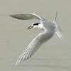 "Forster's Tern with fish © 2009 Nova Mackentley Laguna Atascosa NWR, TX FTF  <div class=""ss-paypal-button""><div class=""ss-paypal-add-to-cart-section""><div class=""ss-paypal-product-options""><h4>Mat Sizes</h4><ul><li><a href=""https://www.paypal.com/cgi-bin/webscr?cmd=_cart&business=T77V5VKCW4K2U&lc=US&item_name=Forster's%20Tern%20with%20fish%20%C2%A9%202009%20Nova%20Mackentley%20Laguna%20Atascosa%20NWR%2C%20TX%20FTF&item_number=http%3A%2F%2Fwww.nightflightimages.com%2FGalleries-1%2FOur-Favorites%2Fi-Cbv5TS2&button_subtype=products&no_note=0&cn=Add%20special%20instructions%20to%20the%20seller%3A&no_shipping=2&currency_code=USD&weight_unit=lbs&add=1&bn=PP-ShopCartBF%3Abtn_cart_SM.gif%3ANonHosted&on0=Mat%20Sizes&option_select0=5%20x%207&option_amount0=10.00&option_select1=8%20x%2010&option_amount1=18.00&option_select2=11%20x%2014&option_amount2=28.00&option_select3=card&option_amount3=4.00&option_index=0&charset=utf-8&submit=&os0=5%20x%207"" target=""paypal""><span>5 x 7 $11.00 USD</span><img src=""https://www.paypalobjects.com/en_US/i/btn/btn_cart_SM.gif""></a></li><li><a href=""https://www.paypal.com/cgi-bin/webscr?cmd=_cart&business=T77V5VKCW4K2U&lc=US&item_name=Forster's%20Tern%20with%20fish%20%C2%A9%202009%20Nova%20Mackentley%20Laguna%20Atascosa%20NWR%2C%20TX%20FTF&item_number=http%3A%2F%2Fwww.nightflightimages.com%2FGalleries-1%2FOur-Favorites%2Fi-Cbv5TS2&button_subtype=products&no_note=0&cn=Add%20special%20instructions%20to%20the%20seller%3A&no_shipping=2&currency_code=USD&weight_unit=lbs&add=1&bn=PP-ShopCartBF%3Abtn_cart_SM.gif%3ANonHosted&on0=Mat%20Sizes&option_select0=5%20x%207&option_amount0=10.00&option_select1=8%20x%2010&option_amount1=18.00&option_select2=11%20x%2014&option_amount2=28.00&option_select3=card&option_amount3=4.00&option_index=0&charset=utf-8&submit=&os0=8%20x%2010"" target=""paypal""><span>8 x 10 $19.00 USD</span><img src=""https://www.paypalobjects.com/en_US/i/btn/btn_cart_SM.gif""></a></li><li><a href=""https://www.paypal.com/cgi-bin/webscr?cmd=_cart&business=T77V5VKCW4K2U&lc=US&item_name=Forster's%20Tern%20with%20fish%20%C2%A9%202009%20Nova%20Mackentley%20Laguna%20Atascosa%20NWR%2C%20TX%20FTF&item_number=http%3A%2F%2Fwww.nightflightimages.com%2FGalleries-1%2FOur-Favorites%2Fi-Cbv5TS2&button_subtype=products&no_note=0&cn=Add%20special%20instructions%20to%20the%20seller%3A&no_shipping=2&currency_code=USD&weight_unit=lbs&add=1&bn=PP-ShopCartBF%3Abtn_cart_SM.gif%3ANonHosted&on0=Mat%20Sizes&option_select0=5%20x%207&option_amount0=10.00&option_select1=8%20x%2010&option_amount1=18.00&option_select2=11%20x%2014&option_amount2=28.00&option_select3=card&option_amount3=4.00&option_index=0&charset=utf-8&submit=&os0=11%20x%2014"" target=""paypal""><span>11 x 14 $29.00 USD</span><img src=""https://www.paypalobjects.com/en_US/i/btn/btn_cart_SM.gif""></a></li><li><a href=""https://www.paypal.com/cgi-bin/webscr?cmd=_cart&business=T77V5VKCW4K2U&lc=US&item_name=Forster's%20Tern%20with%20fish%20%C2%A9%202009%20Nova%20Mackentley%20Laguna%20Atascosa%20NWR%2C%20TX%20FTF&item_number=http%3A%2F%2Fwww.nightflightimages.com%2FGalleries-1%2FOur-Favorites%2Fi-Cbv5TS2&button_subtype=products&no_note=0&cn=Add%20special%20instructions%20to%20the%20seller%3A&no_shipping=2&currency_code=USD&weight_unit=lbs&add=1&bn=PP-ShopCartBF%3Abtn_cart_SM.gif%3ANonHosted&on0=Mat%20Sizes&option_select0=5%20x%207&option_amount0=10.00&option_select1=8%20x%2010&option_amount1=18.00&option_select2=11%20x%2014&option_amount2=28.00&option_select3=card&option_amount3=4.00&option_index=0&charset=utf-8&submit=&os0=card"" target=""paypal""><span>card $5.00 USD</span><img src=""https://www.paypalobjects.com/en_US/i/btn/btn_cart_SM.gif""></a></li></ul></div></div> <div class=""ss-paypal-view-cart-section""><a href=""https://www.paypal.com/cgi-bin/webscr?cmd=_cart&business=T77V5VKCW4K2U&display=1&item_name=Forster's%20Tern%20with%20fish%20%C2%A9%202009%20Nova%20Mackentley%20Laguna%20Atascosa%20NWR%2C%20TX%20FTF&item_number=http%3A%2F%2Fwww.nightflightimages.com%2FGalleries-1%2FOur-Favorites%2Fi-Cbv5TS2&charset=utf-8&submit="" target=""paypal"" class=""ss-paypal-submit-button""><img src=""https://www.paypalobjects.com/en_US/i/btn/btn_viewcart_LG.gif""></a></div></div><div class=""ss-paypal-button-end""></div>"