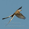"Scissor-tailed Flycatcher © 2008 Nova Mackentley Laguna Atascosa NWR, TX STF  <div class=""ss-paypal-button""><div class=""ss-paypal-add-to-cart-section""><div class=""ss-paypal-product-options""><h4>Mat Sizes</h4><ul><li><a href=""https://www.paypal.com/cgi-bin/webscr?cmd=_cart&amp;business=T77V5VKCW4K2U&amp;lc=US&amp;item_name=Scissor-tailed%20Flycatcher%20%C2%A9%202008%20Nova%20Mackentley%20Laguna%20Atascosa%20NWR%2C%20TX%20STF&amp;item_number=http%3A%2F%2Fwww.nightflightimages.com%2FGalleries-1%2FOur-Favorites%2Fi-FbF8TXm&amp;button_subtype=products&amp;no_note=0&amp;cn=Add%20special%20instructions%20to%20the%20seller%3A&amp;no_shipping=2&amp;currency_code=USD&amp;weight_unit=lbs&amp;add=1&amp;bn=PP-ShopCartBF%3Abtn_cart_SM.gif%3ANonHosted&amp;on0=Mat%20Sizes&amp;option_select0=5%20x%207&amp;option_amount0=10.00&amp;option_select1=8%20x%2010&amp;option_amount1=18.00&amp;option_select2=11%20x%2014&amp;option_amount2=28.00&amp;option_select3=card&amp;option_amount3=4.00&amp;option_index=0&amp;charset=utf-8&amp;submit=&amp;os0=5%20x%207"" target=""paypal""><span>5 x 7 $11.00 USD</span><img src=""https://www.paypalobjects.com/en_US/i/btn/btn_cart_SM.gif""></a></li><li><a href=""https://www.paypal.com/cgi-bin/webscr?cmd=_cart&amp;business=T77V5VKCW4K2U&amp;lc=US&amp;item_name=Scissor-tailed%20Flycatcher%20%C2%A9%202008%20Nova%20Mackentley%20Laguna%20Atascosa%20NWR%2C%20TX%20STF&amp;item_number=http%3A%2F%2Fwww.nightflightimages.com%2FGalleries-1%2FOur-Favorites%2Fi-FbF8TXm&amp;button_subtype=products&amp;no_note=0&amp;cn=Add%20special%20instructions%20to%20the%20seller%3A&amp;no_shipping=2&amp;currency_code=USD&amp;weight_unit=lbs&amp;add=1&amp;bn=PP-ShopCartBF%3Abtn_cart_SM.gif%3ANonHosted&amp;on0=Mat%20Sizes&amp;option_select0=5%20x%207&amp;option_amount0=10.00&amp;option_select1=8%20x%2010&amp;option_amount1=18.00&amp;option_select2=11%20x%2014&amp;option_amount2=28.00&amp;option_select3=card&amp;option_amount3=4.00&amp;option_index=0&amp;charset=utf-8&amp;submit=&amp;os0=8%20x%2010"" target=""paypal""><span>8 x 10 $19.00 USD</span><img src=""https://www.paypalobjects.com/en_US/i/btn/btn_cart_SM.gif""></a></li><li><a href=""https://www.paypal.com/cgi-bin/webscr?cmd=_cart&amp;business=T77V5VKCW4K2U&amp;lc=US&amp;item_name=Scissor-tailed%20Flycatcher%20%C2%A9%202008%20Nova%20Mackentley%20Laguna%20Atascosa%20NWR%2C%20TX%20STF&amp;item_number=http%3A%2F%2Fwww.nightflightimages.com%2FGalleries-1%2FOur-Favorites%2Fi-FbF8TXm&amp;button_subtype=products&amp;no_note=0&amp;cn=Add%20special%20instructions%20to%20the%20seller%3A&amp;no_shipping=2&amp;currency_code=USD&amp;weight_unit=lbs&amp;add=1&amp;bn=PP-ShopCartBF%3Abtn_cart_SM.gif%3ANonHosted&amp;on0=Mat%20Sizes&amp;option_select0=5%20x%207&amp;option_amount0=10.00&amp;option_select1=8%20x%2010&amp;option_amount1=18.00&amp;option_select2=11%20x%2014&amp;option_amount2=28.00&amp;option_select3=card&amp;option_amount3=4.00&amp;option_index=0&amp;charset=utf-8&amp;submit=&amp;os0=11%20x%2014"" target=""paypal""><span>11 x 14 $29.00 USD</span><img src=""https://www.paypalobjects.com/en_US/i/btn/btn_cart_SM.gif""></a></li><li><a href=""https://www.paypal.com/cgi-bin/webscr?cmd=_cart&amp;business=T77V5VKCW4K2U&amp;lc=US&amp;item_name=Scissor-tailed%20Flycatcher%20%C2%A9%202008%20Nova%20Mackentley%20Laguna%20Atascosa%20NWR%2C%20TX%20STF&amp;item_number=http%3A%2F%2Fwww.nightflightimages.com%2FGalleries-1%2FOur-Favorites%2Fi-FbF8TXm&amp;button_subtype=products&amp;no_note=0&amp;cn=Add%20special%20instructions%20to%20the%20seller%3A&amp;no_shipping=2&amp;currency_code=USD&amp;weight_unit=lbs&amp;add=1&amp;bn=PP-ShopCartBF%3Abtn_cart_SM.gif%3ANonHosted&amp;on0=Mat%20Sizes&amp;option_select0=5%20x%207&amp;option_amount0=10.00&amp;option_select1=8%20x%2010&amp;option_amount1=18.00&amp;option_select2=11%20x%2014&amp;option_amount2=28.00&amp;option_select3=card&amp;option_amount3=4.00&amp;option_index=0&amp;charset=utf-8&amp;submit=&amp;os0=card"" target=""paypal""><span>card $5.00 USD</span><img src=""https://www.paypalobjects.com/en_US/i/btn/btn_cart_SM.gif""></a></li></ul></div></div> <div class=""ss-paypal-view-cart-section""><a href=""https://www.paypal.com/cgi-bin/webscr?cmd=_cart&amp;business=T77V5VKCW4K2U&amp;display=1&amp;item_name=Scissor-tailed%20Flycatcher%20%C2%A9%202008%20Nova%20Mackentley%20Laguna%20Atascosa%20NWR%2C%20TX%20STF&amp;item_number=http%3A%2F%2Fwww.nightflightimages.com%2FGalleries-1%2FOur-Favorites%2Fi-FbF8TXm&amp;charset=utf-8&amp;submit="" target=""paypal"" class=""ss-paypal-submit-button""><img src=""https://www.paypalobjects.com/en_US/i/btn/btn_viewcart_LG.gif""></a></div></div><div class=""ss-paypal-button-end""></div>"
