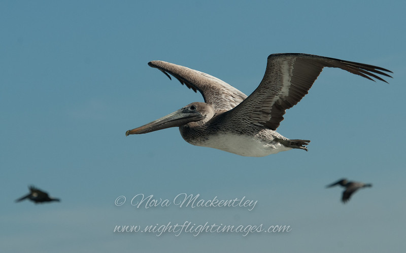 "Brown Pelicans © 2009 Nova Mackentley Boca Chica Beach, TX PE3  <div class=""ss-paypal-button""> <div class=""ss-paypal-add-to-cart-section""><div class=""ss-paypal-product-options""> <h4>Mat Sizes</h4> <ul> <li><a href=""https://www.paypal.com/cgi-bin/webscr?cmd=_cart&business=T77V5VKCW4K2U&lc=US&item_name=Brown%20Pelicans%20%C2%A9%202009%20Nova%20Mackentley%20Boca%20Chica%20Beach%2C%20TX%20PE3&item_number=http%3A%2F%2Fwww.nightflightimages.com%2FGalleries-1%2FLower-Rio-Grande-Valley-TX%2Fi-GPRR3g8&button_subtype=products&no_note=0&cn=Add%20special%20instructions%20to%20the%20seller%3A&no_shipping=2&currency_code=USD&weight_unit=lbs&add=1&bn=PP-ShopCartBF%3Abtn_cart_SM.gif%3ANonHosted&on0=Mat%20Sizes&option_select0=5%20x%207&option_amount0=10.00&option_select1=8%20x%2010&option_amount1=18.00&option_select2=11%20x%2014&option_amount2=28.00&option_select3=card&option_amount3=4.00&option_index=0&submit=&os0=5%20x%207"" target=""paypal""><span>5 x 7 $10.00 USD</span><img src=""https://www.paypalobjects.com/en_US/i/btn/btn_cart_SM.gif""></a></li> <li><a href=""https://www.paypal.com/cgi-bin/webscr?cmd=_cart&business=T77V5VKCW4K2U&lc=US&item_name=Brown%20Pelicans%20%C2%A9%202009%20Nova%20Mackentley%20Boca%20Chica%20Beach%2C%20TX%20PE3&item_number=http%3A%2F%2Fwww.nightflightimages.com%2FGalleries-1%2FLower-Rio-Grande-Valley-TX%2Fi-GPRR3g8&button_subtype=products&no_note=0&cn=Add%20special%20instructions%20to%20the%20seller%3A&no_shipping=2&currency_code=USD&weight_unit=lbs&add=1&bn=PP-ShopCartBF%3Abtn_cart_SM.gif%3ANonHosted&on0=Mat%20Sizes&option_select0=5%20x%207&option_amount0=10.00&option_select1=8%20x%2010&option_amount1=18.00&option_select2=11%20x%2014&option_amount2=28.00&option_select3=card&option_amount3=4.00&option_index=0&submit=&os0=8%20x%2010"" target=""paypal""><span>8 x 10 $18.00 USD</span><img src=""https://www.paypalobjects.com/en_US/i/btn/btn_cart_SM.gif""></a></li> <li><a href=""https://www.paypal.com/cgi-bin/webscr?cmd=_cart&business=T77V5VKCW4K2U&lc=US&item_name=Brown%20Pelicans%20%C2%A9%202009%20Nova%20Mackentley%20Boca%20Chica%20Beach%2C%20TX%20PE3&item_number=http%3A%2F%2Fwww.nightflightimages.com%2FGalleries-1%2FLower-Rio-Grande-Valley-TX%2Fi-GPRR3g8&button_subtype=products&no_note=0&cn=Add%20special%20instructions%20to%20the%20seller%3A&no_shipping=2&currency_code=USD&weight_unit=lbs&add=1&bn=PP-ShopCartBF%3Abtn_cart_SM.gif%3ANonHosted&on0=Mat%20Sizes&option_select0=5%20x%207&option_amount0=10.00&option_select1=8%20x%2010&option_amount1=18.00&option_select2=11%20x%2014&option_amount2=28.00&option_select3=card&option_amount3=4.00&option_index=0&submit=&os0=11%20x%2014"" target=""paypal""><span>11 x 14 $28.00 USD</span><img src=""https://www.paypalobjects.com/en_US/i/btn/btn_cart_SM.gif""></a></li> <li><a href=""https://www.paypal.com/cgi-bin/webscr?cmd=_cart&business=T77V5VKCW4K2U&lc=US&item_name=Brown%20Pelicans%20%C2%A9%202009%20Nova%20Mackentley%20Boca%20Chica%20Beach%2C%20TX%20PE3&item_number=http%3A%2F%2Fwww.nightflightimages.com%2FGalleries-1%2FLower-Rio-Grande-Valley-TX%2Fi-GPRR3g8&button_subtype=products&no_note=0&cn=Add%20special%20instructions%20to%20the%20seller%3A&no_shipping=2&currency_code=USD&weight_unit=lbs&add=1&bn=PP-ShopCartBF%3Abtn_cart_SM.gif%3ANonHosted&on0=Mat%20Sizes&option_select0=5%20x%207&option_amount0=10.00&option_select1=8%20x%2010&option_amount1=18.00&option_select2=11%20x%2014&option_amount2=28.00&option_select3=card&option_amount3=4.00&option_index=0&submit=&os0=card"" target=""paypal""><span>card $4.00 USD</span><img src=""https://www.paypalobjects.com/en_US/i/btn/btn_cart_SM.gif""></a></li> </ul> </div></div> <div class=""ss-paypal-view-cart-section""><a href=""https://www.paypal.com/cgi-bin/webscr?cmd=_cart&business=T77V5VKCW4K2U&display=1&item_name=Brown%20Pelicans%20%C2%A9%202009%20Nova%20Mackentley%20Boca%20Chica%20Beach%2C%20TX%20PE3&item_number=http%3A%2F%2Fwww.nightflightimages.com%2FGalleries-1%2FLower-Rio-Grande-Valley-TX%2Fi-GPRR3g8&submit="" target=""paypal"" class=""ss-paypal-submit-button""><img src=""https://www.paypalobjects.com/en_US/i/btn/btn_viewcart_LG.gif""></a></div> </div><div class=""ss-paypal-button-end"" style=""""></div>"