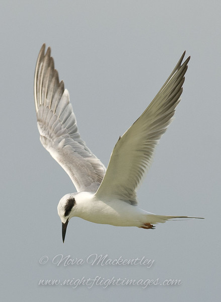 "Forster's Tern © 2009 Nova Mackentley Laguna Atascosa NWR, TX FTE  <div class=""ss-paypal-button""> <div class=""ss-paypal-add-to-cart-section""><div class=""ss-paypal-product-options""> <h4>Mat Sizes</h4> <ul> <li><a href=""https://www.paypal.com/cgi-bin/webscr?cmd=_cart&amp;business=T77V5VKCW4K2U&amp;lc=US&amp;item_name=Forster's%20Tern%20%C2%A9%202009%20Nova%20Mackentley%20Laguna%20Atascosa%20NWR%2C%20TX%20FTE&amp;item_number=http%3A%2F%2Fwww.nightflightimages.com%2FGalleries-1%2FLower-Rio-Grande-Valley-TX%2Fi-GgMnPtF&amp;button_subtype=products&amp;no_note=0&amp;cn=Add%20special%20instructions%20to%20the%20seller%3A&amp;no_shipping=2&amp;currency_code=USD&amp;weight_unit=lbs&amp;add=1&amp;bn=PP-ShopCartBF%3Abtn_cart_SM.gif%3ANonHosted&amp;on0=Mat%20Sizes&amp;option_select0=5%20x%207&amp;option_amount0=10.00&amp;option_select1=8%20x%2010&amp;option_amount1=18.00&amp;option_select2=11%20x%2014&amp;option_amount2=28.00&amp;option_select3=card&amp;option_amount3=4.00&amp;option_index=0&amp;submit=&amp;os0=5%20x%207"" target=""paypal""><span>5 x 7 $10.00 USD</span><img src=""https://www.paypalobjects.com/en_US/i/btn/btn_cart_SM.gif""></a></li> <li><a href=""https://www.paypal.com/cgi-bin/webscr?cmd=_cart&amp;business=T77V5VKCW4K2U&amp;lc=US&amp;item_name=Forster's%20Tern%20%C2%A9%202009%20Nova%20Mackentley%20Laguna%20Atascosa%20NWR%2C%20TX%20FTE&amp;item_number=http%3A%2F%2Fwww.nightflightimages.com%2FGalleries-1%2FLower-Rio-Grande-Valley-TX%2Fi-GgMnPtF&amp;button_subtype=products&amp;no_note=0&amp;cn=Add%20special%20instructions%20to%20the%20seller%3A&amp;no_shipping=2&amp;currency_code=USD&amp;weight_unit=lbs&amp;add=1&amp;bn=PP-ShopCartBF%3Abtn_cart_SM.gif%3ANonHosted&amp;on0=Mat%20Sizes&amp;option_select0=5%20x%207&amp;option_amount0=10.00&amp;option_select1=8%20x%2010&amp;option_amount1=18.00&amp;option_select2=11%20x%2014&amp;option_amount2=28.00&amp;option_select3=card&amp;option_amount3=4.00&amp;option_index=0&amp;submit=&amp;os0=8%20x%2010"" target=""paypal""><span>8 x 10 $18.00 USD</span><img src=""https://www.paypalobjects.com/en_US/i/btn/btn_cart_SM.gif""></a></li> <li><a href=""https://www.paypal.com/cgi-bin/webscr?cmd=_cart&amp;business=T77V5VKCW4K2U&amp;lc=US&amp;item_name=Forster's%20Tern%20%C2%A9%202009%20Nova%20Mackentley%20Laguna%20Atascosa%20NWR%2C%20TX%20FTE&amp;item_number=http%3A%2F%2Fwww.nightflightimages.com%2FGalleries-1%2FLower-Rio-Grande-Valley-TX%2Fi-GgMnPtF&amp;button_subtype=products&amp;no_note=0&amp;cn=Add%20special%20instructions%20to%20the%20seller%3A&amp;no_shipping=2&amp;currency_code=USD&amp;weight_unit=lbs&amp;add=1&amp;bn=PP-ShopCartBF%3Abtn_cart_SM.gif%3ANonHosted&amp;on0=Mat%20Sizes&amp;option_select0=5%20x%207&amp;option_amount0=10.00&amp;option_select1=8%20x%2010&amp;option_amount1=18.00&amp;option_select2=11%20x%2014&amp;option_amount2=28.00&amp;option_select3=card&amp;option_amount3=4.00&amp;option_index=0&amp;submit=&amp;os0=11%20x%2014"" target=""paypal""><span>11 x 14 $28.00 USD</span><img src=""https://www.paypalobjects.com/en_US/i/btn/btn_cart_SM.gif""></a></li> <li><a href=""https://www.paypal.com/cgi-bin/webscr?cmd=_cart&amp;business=T77V5VKCW4K2U&amp;lc=US&amp;item_name=Forster's%20Tern%20%C2%A9%202009%20Nova%20Mackentley%20Laguna%20Atascosa%20NWR%2C%20TX%20FTE&amp;item_number=http%3A%2F%2Fwww.nightflightimages.com%2FGalleries-1%2FLower-Rio-Grande-Valley-TX%2Fi-GgMnPtF&amp;button_subtype=products&amp;no_note=0&amp;cn=Add%20special%20instructions%20to%20the%20seller%3A&amp;no_shipping=2&amp;currency_code=USD&amp;weight_unit=lbs&amp;add=1&amp;bn=PP-ShopCartBF%3Abtn_cart_SM.gif%3ANonHosted&amp;on0=Mat%20Sizes&amp;option_select0=5%20x%207&amp;option_amount0=10.00&amp;option_select1=8%20x%2010&amp;option_amount1=18.00&amp;option_select2=11%20x%2014&amp;option_amount2=28.00&amp;option_select3=card&amp;option_amount3=4.00&amp;option_index=0&amp;submit=&amp;os0=card"" target=""paypal""><span>card $4.00 USD</span><img src=""https://www.paypalobjects.com/en_US/i/btn/btn_cart_SM.gif""></a></li> </ul> </div></div> <div class=""ss-paypal-view-cart-section""><a href=""https://www.paypal.com/cgi-bin/webscr?cmd=_cart&amp;business=T77V5VKCW4K2U&amp;display=1&amp;item_name=Forster's%20Tern%20%C2%A9%202009%20Nova%20Mackentley%20Laguna%20Atascosa%20NWR%2C%20TX%20FTE&amp;item_number=http%3A%2F%2Fwww.nightflightimages.com%2FGalleries-1%2FLower-Rio-Grande-Valley-TX%2Fi-GgMnPtF&amp;submit="" target=""paypal"" class=""ss-paypal-submit-button""><img src=""https://www.paypalobjects.com/en_US/i/btn/btn_viewcart_LG.gif""></a></div> </div><div class=""ss-paypal-button-end"" style=""""></div>"
