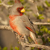 "Pyrrhuloxia © 2010 Nova Mackentley Falcon Dam SP, TX PYR  <div class=""ss-paypal-button""> <div class=""ss-paypal-add-to-cart-section""><div class=""ss-paypal-product-options""> <h4>Mat Sizes</h4> <ul> <li><a href=""https://www.paypal.com/cgi-bin/webscr?cmd=_cart&amp;business=T77V5VKCW4K2U&amp;lc=US&amp;item_name=Pyrrhuloxia%20%C2%A9%202010%20Nova%20Mackentley%20Falcon%20Dam%20SP%2C%20TX%20PYR&amp;item_number=http%3A%2F%2Fwww.nightflightimages.com%2FGalleries-1%2FLower-Rio-Grande-Valley-TX%2Fi-GwbWjww&amp;button_subtype=products&amp;no_note=0&amp;cn=Add%20special%20instructions%20to%20the%20seller%3A&amp;no_shipping=2&amp;currency_code=USD&amp;weight_unit=lbs&amp;add=1&amp;bn=PP-ShopCartBF%3Abtn_cart_SM.gif%3ANonHosted&amp;on0=Mat%20Sizes&amp;option_select0=5%20x%207&amp;option_amount0=10.00&amp;option_select1=8%20x%2010&amp;option_amount1=18.00&amp;option_select2=11%20x%2014&amp;option_amount2=28.00&amp;option_select3=card&amp;option_amount3=4.00&amp;option_index=0&amp;submit=&amp;os0=5%20x%207"" target=""paypal""><span>5 x 7 $10.00 USD</span><img src=""https://www.paypalobjects.com/en_US/i/btn/btn_cart_SM.gif""></a></li> <li><a href=""https://www.paypal.com/cgi-bin/webscr?cmd=_cart&amp;business=T77V5VKCW4K2U&amp;lc=US&amp;item_name=Pyrrhuloxia%20%C2%A9%202010%20Nova%20Mackentley%20Falcon%20Dam%20SP%2C%20TX%20PYR&amp;item_number=http%3A%2F%2Fwww.nightflightimages.com%2FGalleries-1%2FLower-Rio-Grande-Valley-TX%2Fi-GwbWjww&amp;button_subtype=products&amp;no_note=0&amp;cn=Add%20special%20instructions%20to%20the%20seller%3A&amp;no_shipping=2&amp;currency_code=USD&amp;weight_unit=lbs&amp;add=1&amp;bn=PP-ShopCartBF%3Abtn_cart_SM.gif%3ANonHosted&amp;on0=Mat%20Sizes&amp;option_select0=5%20x%207&amp;option_amount0=10.00&amp;option_select1=8%20x%2010&amp;option_amount1=18.00&amp;option_select2=11%20x%2014&amp;option_amount2=28.00&amp;option_select3=card&amp;option_amount3=4.00&amp;option_index=0&amp;submit=&amp;os0=8%20x%2010"" target=""paypal""><span>8 x 10 $18.00 USD</span><img src=""https://www.paypalobjects.com/en_US/i/btn/btn_cart_SM.gif""></a></li> <li><a href=""https://www.paypal.com/cgi-bin/webscr?cmd=_cart&amp;business=T77V5VKCW4K2U&amp;lc=US&amp;item_name=Pyrrhuloxia%20%C2%A9%202010%20Nova%20Mackentley%20Falcon%20Dam%20SP%2C%20TX%20PYR&amp;item_number=http%3A%2F%2Fwww.nightflightimages.com%2FGalleries-1%2FLower-Rio-Grande-Valley-TX%2Fi-GwbWjww&amp;button_subtype=products&amp;no_note=0&amp;cn=Add%20special%20instructions%20to%20the%20seller%3A&amp;no_shipping=2&amp;currency_code=USD&amp;weight_unit=lbs&amp;add=1&amp;bn=PP-ShopCartBF%3Abtn_cart_SM.gif%3ANonHosted&amp;on0=Mat%20Sizes&amp;option_select0=5%20x%207&amp;option_amount0=10.00&amp;option_select1=8%20x%2010&amp;option_amount1=18.00&amp;option_select2=11%20x%2014&amp;option_amount2=28.00&amp;option_select3=card&amp;option_amount3=4.00&amp;option_index=0&amp;submit=&amp;os0=11%20x%2014"" target=""paypal""><span>11 x 14 $28.00 USD</span><img src=""https://www.paypalobjects.com/en_US/i/btn/btn_cart_SM.gif""></a></li> <li><a href=""https://www.paypal.com/cgi-bin/webscr?cmd=_cart&amp;business=T77V5VKCW4K2U&amp;lc=US&amp;item_name=Pyrrhuloxia%20%C2%A9%202010%20Nova%20Mackentley%20Falcon%20Dam%20SP%2C%20TX%20PYR&amp;item_number=http%3A%2F%2Fwww.nightflightimages.com%2FGalleries-1%2FLower-Rio-Grande-Valley-TX%2Fi-GwbWjww&amp;button_subtype=products&amp;no_note=0&amp;cn=Add%20special%20instructions%20to%20the%20seller%3A&amp;no_shipping=2&amp;currency_code=USD&amp;weight_unit=lbs&amp;add=1&amp;bn=PP-ShopCartBF%3Abtn_cart_SM.gif%3ANonHosted&amp;on0=Mat%20Sizes&amp;option_select0=5%20x%207&amp;option_amount0=10.00&amp;option_select1=8%20x%2010&amp;option_amount1=18.00&amp;option_select2=11%20x%2014&amp;option_amount2=28.00&amp;option_select3=card&amp;option_amount3=4.00&amp;option_index=0&amp;submit=&amp;os0=card"" target=""paypal""><span>card $4.00 USD</span><img src=""https://www.paypalobjects.com/en_US/i/btn/btn_cart_SM.gif""></a></li> </ul> </div></div> <div class=""ss-paypal-view-cart-section""><a href=""https://www.paypal.com/cgi-bin/webscr?cmd=_cart&amp;business=T77V5VKCW4K2U&amp;display=1&amp;item_name=Pyrrhuloxia%20%C2%A9%202010%20Nova%20Mackentley%20Falcon%20Dam%20SP%2C%20TX%20PYR&amp;item_number=http%3A%2F%2Fwww.nightflightimages.com%2FGalleries-1%2FLower-Rio-Grande-Valley-TX%2Fi-GwbWjww&amp;submit="" target=""paypal"" class=""ss-paypal-submit-button""><img src=""https://www.paypalobjects.com/en_US/i/btn/btn_viewcart_LG.gif""></a></div> </div><div class=""ss-paypal-button-end"" style=""""></div>"