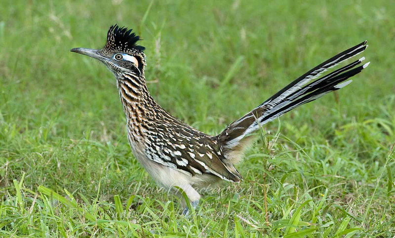 """Roadrunner © 2007 Nova Mackentley Laguna Atascosa NWR, TX RRR  <div class=""""ss-paypal-button""""> <div class=""""ss-paypal-add-to-cart-section""""><div class=""""ss-paypal-product-options""""> <h4>Mat Sizes</h4> <ul> <li><a href=""""https://www.paypal.com/cgi-bin/webscr?cmd=_cart&amp;business=T77V5VKCW4K2U&amp;lc=US&amp;item_name=Roadrunner%20%C2%A9%202007%20Nova%20Mackentley%20Laguna%20Atascosa%20NWR%2C%20TX%20RRR&amp;item_number=http%3A%2F%2Fwww.nightflightimages.com%2FGalleries-1%2FLower-Rio-Grande-Valley-TX%2Fi-JD5DxtR&amp;button_subtype=products&amp;no_note=0&amp;cn=Add%20special%20instructions%20to%20the%20seller%3A&amp;no_shipping=2&amp;currency_code=USD&amp;weight_unit=lbs&amp;add=1&amp;bn=PP-ShopCartBF%3Abtn_cart_SM.gif%3ANonHosted&amp;on0=Mat%20Sizes&amp;option_select0=5%20x%207&amp;option_amount0=10.00&amp;option_select1=8%20x%2010&amp;option_amount1=18.00&amp;option_select2=11%20x%2014&amp;option_amount2=28.00&amp;option_select3=card&amp;option_amount3=4.00&amp;option_index=0&amp;submit=&amp;os0=5%20x%207"""" target=""""paypal""""><span>5 x 7 $10.00 USD</span><img src=""""https://www.paypalobjects.com/en_US/i/btn/btn_cart_SM.gif""""></a></li> <li><a href=""""https://www.paypal.com/cgi-bin/webscr?cmd=_cart&amp;business=T77V5VKCW4K2U&amp;lc=US&amp;item_name=Roadrunner%20%C2%A9%202007%20Nova%20Mackentley%20Laguna%20Atascosa%20NWR%2C%20TX%20RRR&amp;item_number=http%3A%2F%2Fwww.nightflightimages.com%2FGalleries-1%2FLower-Rio-Grande-Valley-TX%2Fi-JD5DxtR&amp;button_subtype=products&amp;no_note=0&amp;cn=Add%20special%20instructions%20to%20the%20seller%3A&amp;no_shipping=2&amp;currency_code=USD&amp;weight_unit=lbs&amp;add=1&amp;bn=PP-ShopCartBF%3Abtn_cart_SM.gif%3ANonHosted&amp;on0=Mat%20Sizes&amp;option_select0=5%20x%207&amp;option_amount0=10.00&amp;option_select1=8%20x%2010&amp;option_amount1=18.00&amp;option_select2=11%20x%2014&amp;option_amount2=28.00&amp;option_select3=card&amp;option_amount3=4.00&amp;option_index=0&amp;submit=&amp;os0=8%20x%2010"""" target=""""paypal""""><span>8 x 10 $18.00 USD</span>"""