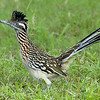 "Roadrunner © 2007 Nova Mackentley Laguna Atascosa NWR, TX RRR  <div class=""ss-paypal-button""> <div class=""ss-paypal-add-to-cart-section""><div class=""ss-paypal-product-options""> <h4>Mat Sizes</h4> <ul> <li><a href=""https://www.paypal.com/cgi-bin/webscr?cmd=_cart&business=T77V5VKCW4K2U&lc=US&item_name=Roadrunner%20%C2%A9%202007%20Nova%20Mackentley%20Laguna%20Atascosa%20NWR%2C%20TX%20RRR&item_number=http%3A%2F%2Fwww.nightflightimages.com%2FGalleries-1%2FLower-Rio-Grande-Valley-TX%2Fi-JD5DxtR&button_subtype=products&no_note=0&cn=Add%20special%20instructions%20to%20the%20seller%3A&no_shipping=2&currency_code=USD&weight_unit=lbs&add=1&bn=PP-ShopCartBF%3Abtn_cart_SM.gif%3ANonHosted&on0=Mat%20Sizes&option_select0=5%20x%207&option_amount0=10.00&option_select1=8%20x%2010&option_amount1=18.00&option_select2=11%20x%2014&option_amount2=28.00&option_select3=card&option_amount3=4.00&option_index=0&submit=&os0=5%20x%207"" target=""paypal""><span>5 x 7 $10.00 USD</span><img src=""https://www.paypalobjects.com/en_US/i/btn/btn_cart_SM.gif""></a></li> <li><a href=""https://www.paypal.com/cgi-bin/webscr?cmd=_cart&business=T77V5VKCW4K2U&lc=US&item_name=Roadrunner%20%C2%A9%202007%20Nova%20Mackentley%20Laguna%20Atascosa%20NWR%2C%20TX%20RRR&item_number=http%3A%2F%2Fwww.nightflightimages.com%2FGalleries-1%2FLower-Rio-Grande-Valley-TX%2Fi-JD5DxtR&button_subtype=products&no_note=0&cn=Add%20special%20instructions%20to%20the%20seller%3A&no_shipping=2&currency_code=USD&weight_unit=lbs&add=1&bn=PP-ShopCartBF%3Abtn_cart_SM.gif%3ANonHosted&on0=Mat%20Sizes&option_select0=5%20x%207&option_amount0=10.00&option_select1=8%20x%2010&option_amount1=18.00&option_select2=11%20x%2014&option_amount2=28.00&option_select3=card&option_amount3=4.00&option_index=0&submit=&os0=8%20x%2010"" target=""paypal""><span>8 x 10 $18.00 USD</span><img src=""https://www.paypalobjects.com/en_US/i/btn/btn_cart_SM.gif""></a></li> <li><a href=""https://www.paypal.com/cgi-bin/webscr?cmd=_cart&business=T77V5VKCW4K2U&lc=US&item_name=Roadrunner%20%C2%A9%202007%20Nova%20Mackentley%20Laguna%20Atascosa%20NWR%2C%20TX%20RRR&item_number=http%3A%2F%2Fwww.nightflightimages.com%2FGalleries-1%2FLower-Rio-Grande-Valley-TX%2Fi-JD5DxtR&button_subtype=products&no_note=0&cn=Add%20special%20instructions%20to%20the%20seller%3A&no_shipping=2&currency_code=USD&weight_unit=lbs&add=1&bn=PP-ShopCartBF%3Abtn_cart_SM.gif%3ANonHosted&on0=Mat%20Sizes&option_select0=5%20x%207&option_amount0=10.00&option_select1=8%20x%2010&option_amount1=18.00&option_select2=11%20x%2014&option_amount2=28.00&option_select3=card&option_amount3=4.00&option_index=0&submit=&os0=11%20x%2014"" target=""paypal""><span>11 x 14 $28.00 USD</span><img src=""https://www.paypalobjects.com/en_US/i/btn/btn_cart_SM.gif""></a></li> <li><a href=""https://www.paypal.com/cgi-bin/webscr?cmd=_cart&business=T77V5VKCW4K2U&lc=US&item_name=Roadrunner%20%C2%A9%202007%20Nova%20Mackentley%20Laguna%20Atascosa%20NWR%2C%20TX%20RRR&item_number=http%3A%2F%2Fwww.nightflightimages.com%2FGalleries-1%2FLower-Rio-Grande-Valley-TX%2Fi-JD5DxtR&button_subtype=products&no_note=0&cn=Add%20special%20instructions%20to%20the%20seller%3A&no_shipping=2&currency_code=USD&weight_unit=lbs&add=1&bn=PP-ShopCartBF%3Abtn_cart_SM.gif%3ANonHosted&on0=Mat%20Sizes&option_select0=5%20x%207&option_amount0=10.00&option_select1=8%20x%2010&option_amount1=18.00&option_select2=11%20x%2014&option_amount2=28.00&option_select3=card&option_amount3=4.00&option_index=0&submit=&os0=card"" target=""paypal""><span>card $4.00 USD</span><img src=""https://www.paypalobjects.com/en_US/i/btn/btn_cart_SM.gif""></a></li> </ul> </div></div> <div class=""ss-paypal-view-cart-section""><a href=""https://www.paypal.com/cgi-bin/webscr?cmd=_cart&business=T77V5VKCW4K2U&display=1&item_name=Roadrunner%20%C2%A9%202007%20Nova%20Mackentley%20Laguna%20Atascosa%20NWR%2C%20TX%20RRR&item_number=http%3A%2F%2Fwww.nightflightimages.com%2FGalleries-1%2FLower-Rio-Grande-Valley-TX%2Fi-JD5DxtR&submit="" target=""paypal"" class=""ss-paypal-submit-button""><img src=""https://www.paypalobjects.com/en_US/i/btn/btn_viewcart_LG.gif""></a></div> </div><div class=""ss-paypal-button-end"" style=""""></div>"
