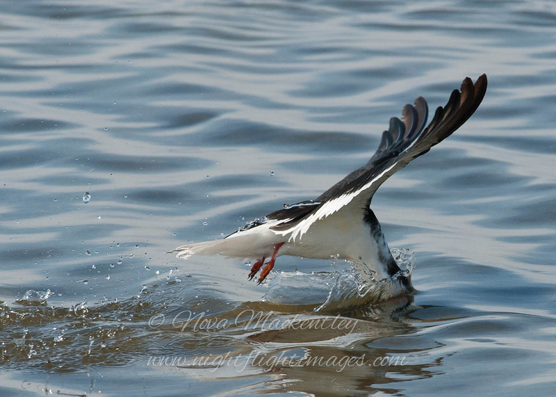 "Black Skimmer © 2010 Nova Mackentley South Padre Island, TX SKG  <div class=""ss-paypal-button""><div class=""ss-paypal-add-to-cart-section""><div class=""ss-paypal-product-options""><h4>Mat Sizes</h4><ul><li><a href=""https://www.paypal.com/cgi-bin/webscr?cmd=_cart&amp;business=T77V5VKCW4K2U&amp;lc=US&amp;item_name=Black%20Skimmer%20%C2%A9%202010%20Nova%20Mackentley%20South%20Padre%20Island%2C%20TX%20SKG&amp;item_number=http%3A%2F%2Fwww.nightflightimages.com%2FGalleries-1%2FOur-Favorites%2Fi-JjSQ5Z6&amp;button_subtype=products&amp;no_note=0&amp;cn=Add%20special%20instructions%20to%20the%20seller%3A&amp;no_shipping=2&amp;currency_code=USD&amp;weight_unit=lbs&amp;add=1&amp;bn=PP-ShopCartBF%3Abtn_cart_SM.gif%3ANonHosted&amp;on0=Mat%20Sizes&amp;option_select0=5%20x%207&amp;option_amount0=10.00&amp;option_select1=8%20x%2010&amp;option_amount1=18.00&amp;option_select2=11%20x%2014&amp;option_amount2=28.00&amp;option_select3=card&amp;option_amount3=4.00&amp;option_index=0&amp;charset=utf-8&amp;submit=&amp;os0=5%20x%207"" target=""paypal""><span>5 x 7 $11.00 USD</span><img src=""https://www.paypalobjects.com/en_US/i/btn/btn_cart_SM.gif""></a></li><li><a href=""https://www.paypal.com/cgi-bin/webscr?cmd=_cart&amp;business=T77V5VKCW4K2U&amp;lc=US&amp;item_name=Black%20Skimmer%20%C2%A9%202010%20Nova%20Mackentley%20South%20Padre%20Island%2C%20TX%20SKG&amp;item_number=http%3A%2F%2Fwww.nightflightimages.com%2FGalleries-1%2FOur-Favorites%2Fi-JjSQ5Z6&amp;button_subtype=products&amp;no_note=0&amp;cn=Add%20special%20instructions%20to%20the%20seller%3A&amp;no_shipping=2&amp;currency_code=USD&amp;weight_unit=lbs&amp;add=1&amp;bn=PP-ShopCartBF%3Abtn_cart_SM.gif%3ANonHosted&amp;on0=Mat%20Sizes&amp;option_select0=5%20x%207&amp;option_amount0=10.00&amp;option_select1=8%20x%2010&amp;option_amount1=18.00&amp;option_select2=11%20x%2014&amp;option_amount2=28.00&amp;option_select3=card&amp;option_amount3=4.00&amp;option_index=0&amp;charset=utf-8&amp;submit=&amp;os0=8%20x%2010"" target=""paypal""><span>8 x 10 $19.00 USD</span><img src=""https://www.paypalobjects.com/en_US/i/btn/btn_cart_SM.gif""></a></li><li><a href=""https://www.paypal.com/cgi-bin/webscr?cmd=_cart&amp;business=T77V5VKCW4K2U&amp;lc=US&amp;item_name=Black%20Skimmer%20%C2%A9%202010%20Nova%20Mackentley%20South%20Padre%20Island%2C%20TX%20SKG&amp;item_number=http%3A%2F%2Fwww.nightflightimages.com%2FGalleries-1%2FOur-Favorites%2Fi-JjSQ5Z6&amp;button_subtype=products&amp;no_note=0&amp;cn=Add%20special%20instructions%20to%20the%20seller%3A&amp;no_shipping=2&amp;currency_code=USD&amp;weight_unit=lbs&amp;add=1&amp;bn=PP-ShopCartBF%3Abtn_cart_SM.gif%3ANonHosted&amp;on0=Mat%20Sizes&amp;option_select0=5%20x%207&amp;option_amount0=10.00&amp;option_select1=8%20x%2010&amp;option_amount1=18.00&amp;option_select2=11%20x%2014&amp;option_amount2=28.00&amp;option_select3=card&amp;option_amount3=4.00&amp;option_index=0&amp;charset=utf-8&amp;submit=&amp;os0=11%20x%2014"" target=""paypal""><span>11 x 14 $29.00 USD</span><img src=""https://www.paypalobjects.com/en_US/i/btn/btn_cart_SM.gif""></a></li><li><a href=""https://www.paypal.com/cgi-bin/webscr?cmd=_cart&amp;business=T77V5VKCW4K2U&amp;lc=US&amp;item_name=Black%20Skimmer%20%C2%A9%202010%20Nova%20Mackentley%20South%20Padre%20Island%2C%20TX%20SKG&amp;item_number=http%3A%2F%2Fwww.nightflightimages.com%2FGalleries-1%2FOur-Favorites%2Fi-JjSQ5Z6&amp;button_subtype=products&amp;no_note=0&amp;cn=Add%20special%20instructions%20to%20the%20seller%3A&amp;no_shipping=2&amp;currency_code=USD&amp;weight_unit=lbs&amp;add=1&amp;bn=PP-ShopCartBF%3Abtn_cart_SM.gif%3ANonHosted&amp;on0=Mat%20Sizes&amp;option_select0=5%20x%207&amp;option_amount0=10.00&amp;option_select1=8%20x%2010&amp;option_amount1=18.00&amp;option_select2=11%20x%2014&amp;option_amount2=28.00&amp;option_select3=card&amp;option_amount3=4.00&amp;option_index=0&amp;charset=utf-8&amp;submit=&amp;os0=card"" target=""paypal""><span>card $5.00 USD</span><img src=""https://www.paypalobjects.com/en_US/i/btn/btn_cart_SM.gif""></a></li></ul></div></div> <div class=""ss-paypal-view-cart-section""><a href=""https://www.paypal.com/cgi-bin/webscr?cmd=_cart&amp;business=T77V5VKCW4K2U&amp;display=1&amp;item_name=Black%20Skimmer%20%C2%A9%202010%20Nova%20Mackentley%20South%20Padre%20Island%2C%20TX%20SKG&amp;item_number=http%3A%2F%2Fwww.nightflightimages.com%2FGalleries-1%2FOur-Favorites%2Fi-JjSQ5Z6&amp;charset=utf-8&amp;submit="" target=""paypal"" class=""ss-paypal-submit-button""><img src=""https://www.paypalobjects.com/en_US/i/btn/btn_viewcart_LG.gif""></a></div></div><div class=""ss-paypal-button-end""></div>"
