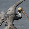 "Brown Pelican © 2010 Nova Mackentley South Padre Island, TX PEL  <div class=""ss-paypal-button""> <div class=""ss-paypal-add-to-cart-section""><div class=""ss-paypal-product-options""> <h4>Mat Sizes</h4> <ul> <li><a href=""https://www.paypal.com/cgi-bin/webscr?cmd=_cart&business=T77V5VKCW4K2U&lc=US&item_name=Brown%20Pelican%20%C2%A9%202010%20Nova%20Mackentley%20South%20Padre%20Island%2C%20TX%20PEL&item_number=http%3A%2F%2Fwww.nightflightimages.com%2FGalleries-1%2FLower-Rio-Grande-Valley-TX%2Fi-Kk8tdLD&button_subtype=products&no_note=0&cn=Add%20special%20instructions%20to%20the%20seller%3A&no_shipping=2&currency_code=USD&weight_unit=lbs&add=1&bn=PP-ShopCartBF%3Abtn_cart_SM.gif%3ANonHosted&on0=Mat%20Sizes&option_select0=5%20x%207&option_amount0=10.00&option_select1=8%20x%2010&option_amount1=18.00&option_select2=11%20x%2014&option_amount2=28.00&option_select3=card&option_amount3=4.00&option_index=0&submit=&os0=5%20x%207"" target=""paypal""><span>5 x 7 $10.00 USD</span><img src=""https://www.paypalobjects.com/en_US/i/btn/btn_cart_SM.gif""></a></li> <li><a href=""https://www.paypal.com/cgi-bin/webscr?cmd=_cart&business=T77V5VKCW4K2U&lc=US&item_name=Brown%20Pelican%20%C2%A9%202010%20Nova%20Mackentley%20South%20Padre%20Island%2C%20TX%20PEL&item_number=http%3A%2F%2Fwww.nightflightimages.com%2FGalleries-1%2FLower-Rio-Grande-Valley-TX%2Fi-Kk8tdLD&button_subtype=products&no_note=0&cn=Add%20special%20instructions%20to%20the%20seller%3A&no_shipping=2&currency_code=USD&weight_unit=lbs&add=1&bn=PP-ShopCartBF%3Abtn_cart_SM.gif%3ANonHosted&on0=Mat%20Sizes&option_select0=5%20x%207&option_amount0=10.00&option_select1=8%20x%2010&option_amount1=18.00&option_select2=11%20x%2014&option_amount2=28.00&option_select3=card&option_amount3=4.00&option_index=0&submit=&os0=8%20x%2010"" target=""paypal""><span>8 x 10 $18.00 USD</span><img src=""https://www.paypalobjects.com/en_US/i/btn/btn_cart_SM.gif""></a></li> <li><a href=""https://www.paypal.com/cgi-bin/webscr?cmd=_cart&business=T77V5VKCW4K2U&lc=US&item_name=Brown%20Pelican%20%C2%A9%202010%20Nova%20Mackentley%20South%20Padre%20Island%2C%20TX%20PEL&item_number=http%3A%2F%2Fwww.nightflightimages.com%2FGalleries-1%2FLower-Rio-Grande-Valley-TX%2Fi-Kk8tdLD&button_subtype=products&no_note=0&cn=Add%20special%20instructions%20to%20the%20seller%3A&no_shipping=2&currency_code=USD&weight_unit=lbs&add=1&bn=PP-ShopCartBF%3Abtn_cart_SM.gif%3ANonHosted&on0=Mat%20Sizes&option_select0=5%20x%207&option_amount0=10.00&option_select1=8%20x%2010&option_amount1=18.00&option_select2=11%20x%2014&option_amount2=28.00&option_select3=card&option_amount3=4.00&option_index=0&submit=&os0=11%20x%2014"" target=""paypal""><span>11 x 14 $28.00 USD</span><img src=""https://www.paypalobjects.com/en_US/i/btn/btn_cart_SM.gif""></a></li> <li><a href=""https://www.paypal.com/cgi-bin/webscr?cmd=_cart&business=T77V5VKCW4K2U&lc=US&item_name=Brown%20Pelican%20%C2%A9%202010%20Nova%20Mackentley%20South%20Padre%20Island%2C%20TX%20PEL&item_number=http%3A%2F%2Fwww.nightflightimages.com%2FGalleries-1%2FLower-Rio-Grande-Valley-TX%2Fi-Kk8tdLD&button_subtype=products&no_note=0&cn=Add%20special%20instructions%20to%20the%20seller%3A&no_shipping=2&currency_code=USD&weight_unit=lbs&add=1&bn=PP-ShopCartBF%3Abtn_cart_SM.gif%3ANonHosted&on0=Mat%20Sizes&option_select0=5%20x%207&option_amount0=10.00&option_select1=8%20x%2010&option_amount1=18.00&option_select2=11%20x%2014&option_amount2=28.00&option_select3=card&option_amount3=4.00&option_index=0&submit=&os0=card"" target=""paypal""><span>card $4.00 USD</span><img src=""https://www.paypalobjects.com/en_US/i/btn/btn_cart_SM.gif""></a></li> </ul> </div></div> <div class=""ss-paypal-view-cart-section""><a href=""https://www.paypal.com/cgi-bin/webscr?cmd=_cart&business=T77V5VKCW4K2U&display=1&item_name=Brown%20Pelican%20%C2%A9%202010%20Nova%20Mackentley%20South%20Padre%20Island%2C%20TX%20PEL&item_number=http%3A%2F%2Fwww.nightflightimages.com%2FGalleries-1%2FLower-Rio-Grande-Valley-TX%2Fi-Kk8tdLD&submit="" target=""paypal"" class=""ss-paypal-submit-button""><img src=""https://www.paypalobjects.com/en_US/i/btn/btn_viewcart_LG.gif""></a></div> </div><div class=""ss-paypal-button-end"" style=""""></div>"