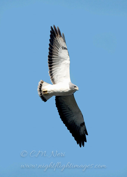 """White-tailed Hawk © 2009 C. M. Neri.  Laguna Atascosa NWR, TX WTHA  <div class=""""ss-paypal-button""""><div class=""""ss-paypal-add-to-cart-section""""><div class=""""ss-paypal-product-options""""><h4>Mat Sizes</h4><ul><li><a href=""""https://www.paypal.com/cgi-bin/webscr?cmd=_cart&business=T77V5VKCW4K2U&lc=US&item_name=White-tailed%20Hawk%20%C2%A9%202009%20C.%20M.%20Neri.%20%20Laguna%20Atascosa%20NWR%2C%20TX%20WTHA&item_number=http%3A%2F%2Fwww.nightflightimages.com%2FGalleries-1%2FHawks%2Fi-LTwqh9b&button_subtype=products&no_note=0&cn=Add%20special%20instructions%20to%20the%20seller%3A&no_shipping=2&currency_code=USD&weight_unit=lbs&add=1&bn=PP-ShopCartBF%3Abtn_cart_SM.gif%3ANonHosted&on0=Mat%20Sizes&option_select0=5%20x%207&option_amount0=10.00&option_select1=8%20x%2010&option_amount1=18.00&option_select2=11%20x%2014&option_amount2=28.00&option_select3=card&option_amount3=4.00&option_index=0&charset=utf-8&submit=&os0=5%20x%207"""" target=""""paypal""""><span>5 x 7 $11.00 USD</span><img src=""""https://www.paypalobjects.com/en_US/i/btn/btn_cart_SM.gif""""></a></li><li><a href=""""https://www.paypal.com/cgi-bin/webscr?cmd=_cart&business=T77V5VKCW4K2U&lc=US&item_name=White-tailed%20Hawk%20%C2%A9%202009%20C.%20M.%20Neri.%20%20Laguna%20Atascosa%20NWR%2C%20TX%20WTHA&item_number=http%3A%2F%2Fwww.nightflightimages.com%2FGalleries-1%2FHawks%2Fi-LTwqh9b&button_subtype=products&no_note=0&cn=Add%20special%20instructions%20to%20the%20seller%3A&no_shipping=2&currency_code=USD&weight_unit=lbs&add=1&bn=PP-ShopCartBF%3Abtn_cart_SM.gif%3ANonHosted&on0=Mat%20Sizes&option_select0=5%20x%207&option_amount0=10.00&option_select1=8%20x%2010&option_amount1=18.00&option_select2=11%20x%2014&option_amount2=28.00&option_select3=card&option_amount3=4.00&option_index=0&charset=utf-8&submit=&os0=8%20x%2010"""" target=""""paypal""""><span>8 x 10 $19.00 USD</span><img src=""""https://www.paypalobjects.com/en_US/i/btn/btn_cart_SM.gif""""></a></li><li><a href=""""https://www.paypal.com/cgi-bin/webscr?cmd=_cart&business=T77V5VKCW4K2U&lc=US&item_name=White-"""