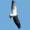 "White-tailed Hawk © 2009 C. M. Neri.  Laguna Atascosa NWR, TX WTHA  <div class=""ss-paypal-button""><div class=""ss-paypal-add-to-cart-section""><div class=""ss-paypal-product-options""><h4>Mat Sizes</h4><ul><li><a href=""https://www.paypal.com/cgi-bin/webscr?cmd=_cart&business=T77V5VKCW4K2U&lc=US&item_name=White-tailed%20Hawk%20%C2%A9%202009%20C.%20M.%20Neri.%20%20Laguna%20Atascosa%20NWR%2C%20TX%20WTHA&item_number=http%3A%2F%2Fwww.nightflightimages.com%2FGalleries-1%2FHawks%2Fi-LTwqh9b&button_subtype=products&no_note=0&cn=Add%20special%20instructions%20to%20the%20seller%3A&no_shipping=2&currency_code=USD&weight_unit=lbs&add=1&bn=PP-ShopCartBF%3Abtn_cart_SM.gif%3ANonHosted&on0=Mat%20Sizes&option_select0=5%20x%207&option_amount0=10.00&option_select1=8%20x%2010&option_amount1=18.00&option_select2=11%20x%2014&option_amount2=28.00&option_select3=card&option_amount3=4.00&option_index=0&charset=utf-8&submit=&os0=5%20x%207"" target=""paypal""><span>5 x 7 $11.00 USD</span><img src=""https://www.paypalobjects.com/en_US/i/btn/btn_cart_SM.gif""></a></li><li><a href=""https://www.paypal.com/cgi-bin/webscr?cmd=_cart&business=T77V5VKCW4K2U&lc=US&item_name=White-tailed%20Hawk%20%C2%A9%202009%20C.%20M.%20Neri.%20%20Laguna%20Atascosa%20NWR%2C%20TX%20WTHA&item_number=http%3A%2F%2Fwww.nightflightimages.com%2FGalleries-1%2FHawks%2Fi-LTwqh9b&button_subtype=products&no_note=0&cn=Add%20special%20instructions%20to%20the%20seller%3A&no_shipping=2&currency_code=USD&weight_unit=lbs&add=1&bn=PP-ShopCartBF%3Abtn_cart_SM.gif%3ANonHosted&on0=Mat%20Sizes&option_select0=5%20x%207&option_amount0=10.00&option_select1=8%20x%2010&option_amount1=18.00&option_select2=11%20x%2014&option_amount2=28.00&option_select3=card&option_amount3=4.00&option_index=0&charset=utf-8&submit=&os0=8%20x%2010"" target=""paypal""><span>8 x 10 $19.00 USD</span><img src=""https://www.paypalobjects.com/en_US/i/btn/btn_cart_SM.gif""></a></li><li><a href=""https://www.paypal.com/cgi-bin/webscr?cmd=_cart&business=T77V5VKCW4K2U&lc=US&item_name=White-tailed%20Hawk%20%C2%A9%202009%20C.%20M.%20Neri.%20%20Laguna%20Atascosa%20NWR%2C%20TX%20WTHA&item_number=http%3A%2F%2Fwww.nightflightimages.com%2FGalleries-1%2FHawks%2Fi-LTwqh9b&button_subtype=products&no_note=0&cn=Add%20special%20instructions%20to%20the%20seller%3A&no_shipping=2&currency_code=USD&weight_unit=lbs&add=1&bn=PP-ShopCartBF%3Abtn_cart_SM.gif%3ANonHosted&on0=Mat%20Sizes&option_select0=5%20x%207&option_amount0=10.00&option_select1=8%20x%2010&option_amount1=18.00&option_select2=11%20x%2014&option_amount2=28.00&option_select3=card&option_amount3=4.00&option_index=0&charset=utf-8&submit=&os0=11%20x%2014"" target=""paypal""><span>11 x 14 $29.00 USD</span><img src=""https://www.paypalobjects.com/en_US/i/btn/btn_cart_SM.gif""></a></li><li><a href=""https://www.paypal.com/cgi-bin/webscr?cmd=_cart&business=T77V5VKCW4K2U&lc=US&item_name=White-tailed%20Hawk%20%C2%A9%202009%20C.%20M.%20Neri.%20%20Laguna%20Atascosa%20NWR%2C%20TX%20WTHA&item_number=http%3A%2F%2Fwww.nightflightimages.com%2FGalleries-1%2FHawks%2Fi-LTwqh9b&button_subtype=products&no_note=0&cn=Add%20special%20instructions%20to%20the%20seller%3A&no_shipping=2&currency_code=USD&weight_unit=lbs&add=1&bn=PP-ShopCartBF%3Abtn_cart_SM.gif%3ANonHosted&on0=Mat%20Sizes&option_select0=5%20x%207&option_amount0=10.00&option_select1=8%20x%2010&option_amount1=18.00&option_select2=11%20x%2014&option_amount2=28.00&option_select3=card&option_amount3=4.00&option_index=0&charset=utf-8&submit=&os0=card"" target=""paypal""><span>card $5.00 USD</span><img src=""https://www.paypalobjects.com/en_US/i/btn/btn_cart_SM.gif""></a></li></ul></div></div> <div class=""ss-paypal-view-cart-section""><a href=""https://www.paypal.com/cgi-bin/webscr?cmd=_cart&business=T77V5VKCW4K2U&display=1&item_name=White-tailed%20Hawk%20%C2%A9%202009%20C.%20M.%20Neri.%20%20Laguna%20Atascosa%20NWR%2C%20TX%20WTHA&item_number=http%3A%2F%2Fwww.nightflightimages.com%2FGalleries-1%2FHawks%2Fi-LTwqh9b&charset=utf-8&submit="" target=""paypal"" class=""ss-paypal-submit-button""><img src=""https://www.paypalobjects.com/en_US/i/btn/btn_viewcart_LG.gif""></a></div></div><div class=""ss-paypal-button-end""></div>"