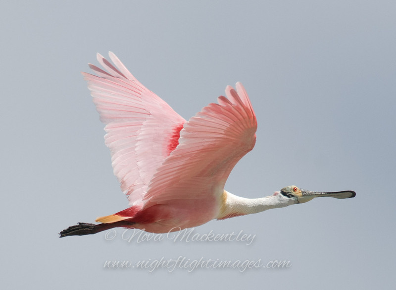 """Spoonbill in flight © 2009 Nova Mackentley Laguna Atascosa NWR, TX SPO  <div class=""""ss-paypal-button""""> <div class=""""ss-paypal-add-to-cart-section""""><div class=""""ss-paypal-product-options""""> <h4>Mat Sizes</h4> <ul> <li><a href=""""https://www.paypal.com/cgi-bin/webscr?cmd=_cart&amp;business=T77V5VKCW4K2U&amp;lc=US&amp;item_name=Spoonbill%20in%20flight%20%C2%A9%202009%20Nova%20Mackentley%20Laguna%20Atascosa%20NWR%2C%20TX%20SPO&amp;item_number=http%3A%2F%2Fwww.nightflightimages.com%2FGalleries-1%2FLower-Rio-Grande-Valley-TX%2Fi-MnGXgsD&amp;button_subtype=products&amp;no_note=0&amp;cn=Add%20special%20instructions%20to%20the%20seller%3A&amp;no_shipping=2&amp;currency_code=USD&amp;weight_unit=lbs&amp;add=1&amp;bn=PP-ShopCartBF%3Abtn_cart_SM.gif%3ANonHosted&amp;on0=Mat%20Sizes&amp;option_select0=5%20x%207&amp;option_amount0=10.00&amp;option_select1=8%20x%2010&amp;option_amount1=18.00&amp;option_select2=11%20x%2014&amp;option_amount2=28.00&amp;option_select3=card&amp;option_amount3=4.00&amp;option_index=0&amp;submit=&amp;os0=5%20x%207"""" target=""""paypal""""><span>5 x 7 $10.00 USD</span><img src=""""https://www.paypalobjects.com/en_US/i/btn/btn_cart_SM.gif""""></a></li> <li><a href=""""https://www.paypal.com/cgi-bin/webscr?cmd=_cart&amp;business=T77V5VKCW4K2U&amp;lc=US&amp;item_name=Spoonbill%20in%20flight%20%C2%A9%202009%20Nova%20Mackentley%20Laguna%20Atascosa%20NWR%2C%20TX%20SPO&amp;item_number=http%3A%2F%2Fwww.nightflightimages.com%2FGalleries-1%2FLower-Rio-Grande-Valley-TX%2Fi-MnGXgsD&amp;button_subtype=products&amp;no_note=0&amp;cn=Add%20special%20instructions%20to%20the%20seller%3A&amp;no_shipping=2&amp;currency_code=USD&amp;weight_unit=lbs&amp;add=1&amp;bn=PP-ShopCartBF%3Abtn_cart_SM.gif%3ANonHosted&amp;on0=Mat%20Sizes&amp;option_select0=5%20x%207&amp;option_amount0=10.00&amp;option_select1=8%20x%2010&amp;option_amount1=18.00&amp;option_select2=11%20x%2014&amp;option_amount2=28.00&amp;option_select3=card&amp;option_amount3=4.00&amp;option_index=0&amp;submit=&amp;os0=8%20x%2010"""" target=""""pay"""