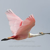 "Spoonbill in flight © 2009 Nova Mackentley Laguna Atascosa NWR, TX SPO  <div class=""ss-paypal-button""> <div class=""ss-paypal-add-to-cart-section""><div class=""ss-paypal-product-options""> <h4>Mat Sizes</h4> <ul> <li><a href=""https://www.paypal.com/cgi-bin/webscr?cmd=_cart&amp;business=T77V5VKCW4K2U&amp;lc=US&amp;item_name=Spoonbill%20in%20flight%20%C2%A9%202009%20Nova%20Mackentley%20Laguna%20Atascosa%20NWR%2C%20TX%20SPO&amp;item_number=http%3A%2F%2Fwww.nightflightimages.com%2FGalleries-1%2FLower-Rio-Grande-Valley-TX%2Fi-MnGXgsD&amp;button_subtype=products&amp;no_note=0&amp;cn=Add%20special%20instructions%20to%20the%20seller%3A&amp;no_shipping=2&amp;currency_code=USD&amp;weight_unit=lbs&amp;add=1&amp;bn=PP-ShopCartBF%3Abtn_cart_SM.gif%3ANonHosted&amp;on0=Mat%20Sizes&amp;option_select0=5%20x%207&amp;option_amount0=10.00&amp;option_select1=8%20x%2010&amp;option_amount1=18.00&amp;option_select2=11%20x%2014&amp;option_amount2=28.00&amp;option_select3=card&amp;option_amount3=4.00&amp;option_index=0&amp;submit=&amp;os0=5%20x%207"" target=""paypal""><span>5 x 7 $10.00 USD</span><img src=""https://www.paypalobjects.com/en_US/i/btn/btn_cart_SM.gif""></a></li> <li><a href=""https://www.paypal.com/cgi-bin/webscr?cmd=_cart&amp;business=T77V5VKCW4K2U&amp;lc=US&amp;item_name=Spoonbill%20in%20flight%20%C2%A9%202009%20Nova%20Mackentley%20Laguna%20Atascosa%20NWR%2C%20TX%20SPO&amp;item_number=http%3A%2F%2Fwww.nightflightimages.com%2FGalleries-1%2FLower-Rio-Grande-Valley-TX%2Fi-MnGXgsD&amp;button_subtype=products&amp;no_note=0&amp;cn=Add%20special%20instructions%20to%20the%20seller%3A&amp;no_shipping=2&amp;currency_code=USD&amp;weight_unit=lbs&amp;add=1&amp;bn=PP-ShopCartBF%3Abtn_cart_SM.gif%3ANonHosted&amp;on0=Mat%20Sizes&amp;option_select0=5%20x%207&amp;option_amount0=10.00&amp;option_select1=8%20x%2010&amp;option_amount1=18.00&amp;option_select2=11%20x%2014&amp;option_amount2=28.00&amp;option_select3=card&amp;option_amount3=4.00&amp;option_index=0&amp;submit=&amp;os0=8%20x%2010"" target=""paypal""><span>8 x 10 $18.00 USD</span><img src=""https://www.paypalobjects.com/en_US/i/btn/btn_cart_SM.gif""></a></li> <li><a href=""https://www.paypal.com/cgi-bin/webscr?cmd=_cart&amp;business=T77V5VKCW4K2U&amp;lc=US&amp;item_name=Spoonbill%20in%20flight%20%C2%A9%202009%20Nova%20Mackentley%20Laguna%20Atascosa%20NWR%2C%20TX%20SPO&amp;item_number=http%3A%2F%2Fwww.nightflightimages.com%2FGalleries-1%2FLower-Rio-Grande-Valley-TX%2Fi-MnGXgsD&amp;button_subtype=products&amp;no_note=0&amp;cn=Add%20special%20instructions%20to%20the%20seller%3A&amp;no_shipping=2&amp;currency_code=USD&amp;weight_unit=lbs&amp;add=1&amp;bn=PP-ShopCartBF%3Abtn_cart_SM.gif%3ANonHosted&amp;on0=Mat%20Sizes&amp;option_select0=5%20x%207&amp;option_amount0=10.00&amp;option_select1=8%20x%2010&amp;option_amount1=18.00&amp;option_select2=11%20x%2014&amp;option_amount2=28.00&amp;option_select3=card&amp;option_amount3=4.00&amp;option_index=0&amp;submit=&amp;os0=11%20x%2014"" target=""paypal""><span>11 x 14 $28.00 USD</span><img src=""https://www.paypalobjects.com/en_US/i/btn/btn_cart_SM.gif""></a></li> <li><a href=""https://www.paypal.com/cgi-bin/webscr?cmd=_cart&amp;business=T77V5VKCW4K2U&amp;lc=US&amp;item_name=Spoonbill%20in%20flight%20%C2%A9%202009%20Nova%20Mackentley%20Laguna%20Atascosa%20NWR%2C%20TX%20SPO&amp;item_number=http%3A%2F%2Fwww.nightflightimages.com%2FGalleries-1%2FLower-Rio-Grande-Valley-TX%2Fi-MnGXgsD&amp;button_subtype=products&amp;no_note=0&amp;cn=Add%20special%20instructions%20to%20the%20seller%3A&amp;no_shipping=2&amp;currency_code=USD&amp;weight_unit=lbs&amp;add=1&amp;bn=PP-ShopCartBF%3Abtn_cart_SM.gif%3ANonHosted&amp;on0=Mat%20Sizes&amp;option_select0=5%20x%207&amp;option_amount0=10.00&amp;option_select1=8%20x%2010&amp;option_amount1=18.00&amp;option_select2=11%20x%2014&amp;option_amount2=28.00&amp;option_select3=card&amp;option_amount3=4.00&amp;option_index=0&amp;submit=&amp;os0=card"" target=""paypal""><span>card $4.00 USD</span><img src=""https://www.paypalobjects.com/en_US/i/btn/btn_cart_SM.gif""></a></li> </ul> </div></div> <div class=""ss-paypal-view-cart-section""><a href=""https://www.paypal.com/cgi-bin/webscr?cmd=_cart&amp;business=T77V5VKCW4K2U&amp;display=1&amp;item_name=Spoonbill%20in%20flight%20%C2%A9%202009%20Nova%20Mackentley%20Laguna%20Atascosa%20NWR%2C%20TX%20SPO&amp;item_number=http%3A%2F%2Fwww.nightflightimages.com%2FGalleries-1%2FLower-Rio-Grande-Valley-TX%2Fi-MnGXgsD&amp;submit="" target=""paypal"" class=""ss-paypal-submit-button""><img src=""https://www.paypalobjects.com/en_US/i/btn/btn_viewcart_LG.gif""></a></div> </div><div class=""ss-paypal-button-end"" style=""""></div>"