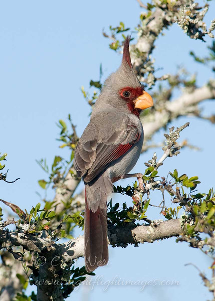 """Pyrrhuloxia © 2010 C. M. Neri. Falcon Dam State Park, TX PYRO  <div class=""""ss-paypal-button""""> <div class=""""ss-paypal-add-to-cart-section""""><div class=""""ss-paypal-product-options""""> <h4>Mat Sizes</h4> <ul> <li><a href=""""https://www.paypal.com/cgi-bin/webscr?cmd=_cart&amp;business=T77V5VKCW4K2U&amp;lc=US&amp;item_name=Pyrrhuloxia%20%C2%A9%202010%20C.%20M.%20Neri.%20Falcon%20Dam%20State%20Park%2C%20TX%20PYRO&amp;item_number=http%3A%2F%2Fwww.nightflightimages.com%2FGalleries-1%2FLower-Rio-Grande-Valley-TX%2Fi-Nkjk6SN&amp;button_subtype=products&amp;no_note=0&amp;cn=Add%20special%20instructions%20to%20the%20seller%3A&amp;no_shipping=2&amp;currency_code=USD&amp;weight_unit=lbs&amp;add=1&amp;bn=PP-ShopCartBF%3Abtn_cart_SM.gif%3ANonHosted&amp;on0=Mat%20Sizes&amp;option_select0=5%20x%207&amp;option_amount0=10.00&amp;option_select1=8%20x%2010&amp;option_amount1=18.00&amp;option_select2=11%20x%2014&amp;option_amount2=28.00&amp;option_select3=card&amp;option_amount3=4.00&amp;option_index=0&amp;submit=&amp;os0=5%20x%207"""" target=""""paypal""""><span>5 x 7 $10.00 USD</span><img src=""""https://www.paypalobjects.com/en_US/i/btn/btn_cart_SM.gif""""></a></li> <li><a href=""""https://www.paypal.com/cgi-bin/webscr?cmd=_cart&amp;business=T77V5VKCW4K2U&amp;lc=US&amp;item_name=Pyrrhuloxia%20%C2%A9%202010%20C.%20M.%20Neri.%20Falcon%20Dam%20State%20Park%2C%20TX%20PYRO&amp;item_number=http%3A%2F%2Fwww.nightflightimages.com%2FGalleries-1%2FLower-Rio-Grande-Valley-TX%2Fi-Nkjk6SN&amp;button_subtype=products&amp;no_note=0&amp;cn=Add%20special%20instructions%20to%20the%20seller%3A&amp;no_shipping=2&amp;currency_code=USD&amp;weight_unit=lbs&amp;add=1&amp;bn=PP-ShopCartBF%3Abtn_cart_SM.gif%3ANonHosted&amp;on0=Mat%20Sizes&amp;option_select0=5%20x%207&amp;option_amount0=10.00&amp;option_select1=8%20x%2010&amp;option_amount1=18.00&amp;option_select2=11%20x%2014&amp;option_amount2=28.00&amp;option_select3=card&amp;option_amount3=4.00&amp;option_index=0&amp;submit=&amp;os0=8%20x%2010"""" target=""""paypal""""><span>8 x 10 $18.00 US"""