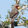 "Pyrrhuloxia © 2010 C. M. Neri. Falcon Dam State Park, TX PYRO  <div class=""ss-paypal-button""> <div class=""ss-paypal-add-to-cart-section""><div class=""ss-paypal-product-options""> <h4>Mat Sizes</h4> <ul> <li><a href=""https://www.paypal.com/cgi-bin/webscr?cmd=_cart&amp;business=T77V5VKCW4K2U&amp;lc=US&amp;item_name=Pyrrhuloxia%20%C2%A9%202010%20C.%20M.%20Neri.%20Falcon%20Dam%20State%20Park%2C%20TX%20PYRO&amp;item_number=http%3A%2F%2Fwww.nightflightimages.com%2FGalleries-1%2FLower-Rio-Grande-Valley-TX%2Fi-Nkjk6SN&amp;button_subtype=products&amp;no_note=0&amp;cn=Add%20special%20instructions%20to%20the%20seller%3A&amp;no_shipping=2&amp;currency_code=USD&amp;weight_unit=lbs&amp;add=1&amp;bn=PP-ShopCartBF%3Abtn_cart_SM.gif%3ANonHosted&amp;on0=Mat%20Sizes&amp;option_select0=5%20x%207&amp;option_amount0=10.00&amp;option_select1=8%20x%2010&amp;option_amount1=18.00&amp;option_select2=11%20x%2014&amp;option_amount2=28.00&amp;option_select3=card&amp;option_amount3=4.00&amp;option_index=0&amp;submit=&amp;os0=5%20x%207"" target=""paypal""><span>5 x 7 $10.00 USD</span><img src=""https://www.paypalobjects.com/en_US/i/btn/btn_cart_SM.gif""></a></li> <li><a href=""https://www.paypal.com/cgi-bin/webscr?cmd=_cart&amp;business=T77V5VKCW4K2U&amp;lc=US&amp;item_name=Pyrrhuloxia%20%C2%A9%202010%20C.%20M.%20Neri.%20Falcon%20Dam%20State%20Park%2C%20TX%20PYRO&amp;item_number=http%3A%2F%2Fwww.nightflightimages.com%2FGalleries-1%2FLower-Rio-Grande-Valley-TX%2Fi-Nkjk6SN&amp;button_subtype=products&amp;no_note=0&amp;cn=Add%20special%20instructions%20to%20the%20seller%3A&amp;no_shipping=2&amp;currency_code=USD&amp;weight_unit=lbs&amp;add=1&amp;bn=PP-ShopCartBF%3Abtn_cart_SM.gif%3ANonHosted&amp;on0=Mat%20Sizes&amp;option_select0=5%20x%207&amp;option_amount0=10.00&amp;option_select1=8%20x%2010&amp;option_amount1=18.00&amp;option_select2=11%20x%2014&amp;option_amount2=28.00&amp;option_select3=card&amp;option_amount3=4.00&amp;option_index=0&amp;submit=&amp;os0=8%20x%2010"" target=""paypal""><span>8 x 10 $18.00 USD</span><img src=""https://www.paypalobjects.com/en_US/i/btn/btn_cart_SM.gif""></a></li> <li><a href=""https://www.paypal.com/cgi-bin/webscr?cmd=_cart&amp;business=T77V5VKCW4K2U&amp;lc=US&amp;item_name=Pyrrhuloxia%20%C2%A9%202010%20C.%20M.%20Neri.%20Falcon%20Dam%20State%20Park%2C%20TX%20PYRO&amp;item_number=http%3A%2F%2Fwww.nightflightimages.com%2FGalleries-1%2FLower-Rio-Grande-Valley-TX%2Fi-Nkjk6SN&amp;button_subtype=products&amp;no_note=0&amp;cn=Add%20special%20instructions%20to%20the%20seller%3A&amp;no_shipping=2&amp;currency_code=USD&amp;weight_unit=lbs&amp;add=1&amp;bn=PP-ShopCartBF%3Abtn_cart_SM.gif%3ANonHosted&amp;on0=Mat%20Sizes&amp;option_select0=5%20x%207&amp;option_amount0=10.00&amp;option_select1=8%20x%2010&amp;option_amount1=18.00&amp;option_select2=11%20x%2014&amp;option_amount2=28.00&amp;option_select3=card&amp;option_amount3=4.00&amp;option_index=0&amp;submit=&amp;os0=11%20x%2014"" target=""paypal""><span>11 x 14 $28.00 USD</span><img src=""https://www.paypalobjects.com/en_US/i/btn/btn_cart_SM.gif""></a></li> <li><a href=""https://www.paypal.com/cgi-bin/webscr?cmd=_cart&amp;business=T77V5VKCW4K2U&amp;lc=US&amp;item_name=Pyrrhuloxia%20%C2%A9%202010%20C.%20M.%20Neri.%20Falcon%20Dam%20State%20Park%2C%20TX%20PYRO&amp;item_number=http%3A%2F%2Fwww.nightflightimages.com%2FGalleries-1%2FLower-Rio-Grande-Valley-TX%2Fi-Nkjk6SN&amp;button_subtype=products&amp;no_note=0&amp;cn=Add%20special%20instructions%20to%20the%20seller%3A&amp;no_shipping=2&amp;currency_code=USD&amp;weight_unit=lbs&amp;add=1&amp;bn=PP-ShopCartBF%3Abtn_cart_SM.gif%3ANonHosted&amp;on0=Mat%20Sizes&amp;option_select0=5%20x%207&amp;option_amount0=10.00&amp;option_select1=8%20x%2010&amp;option_amount1=18.00&amp;option_select2=11%20x%2014&amp;option_amount2=28.00&amp;option_select3=card&amp;option_amount3=4.00&amp;option_index=0&amp;submit=&amp;os0=card"" target=""paypal""><span>card $4.00 USD</span><img src=""https://www.paypalobjects.com/en_US/i/btn/btn_cart_SM.gif""></a></li> </ul> </div></div> <div class=""ss-paypal-view-cart-section""><a href=""https://www.paypal.com/cgi-bin/webscr?cmd=_cart&amp;business=T77V5VKCW4K2U&amp;display=1&amp;item_name=Pyrrhuloxia%20%C2%A9%202010%20C.%20M.%20Neri.%20Falcon%20Dam%20State%20Park%2C%20TX%20PYRO&amp;item_number=http%3A%2F%2Fwww.nightflightimages.com%2FGalleries-1%2FLower-Rio-Grande-Valley-TX%2Fi-Nkjk6SN&amp;submit="" target=""paypal"" class=""ss-paypal-submit-button""><img src=""https://www.paypalobjects.com/en_US/i/btn/btn_viewcart_LG.gif""></a></div> </div><div class=""ss-paypal-button-end"" style=""""></div>"
