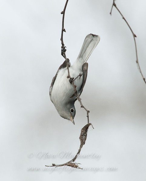 "Blue-gray Gnatcatcher © 2010 Nova Mackentley Bentsen-Rio Grande SP, TX BGN  <div class=""ss-paypal-button""><div class=""ss-paypal-add-to-cart-section""><div class=""ss-paypal-product-options""><h4>Mat Sizes</h4><ul><li><a href=""https://www.paypal.com/cgi-bin/webscr?cmd=_cart&amp;business=T77V5VKCW4K2U&amp;lc=US&amp;item_name=Blue-gray%20Gnatcatcher%20%C2%A9%202010%20Nova%20Mackentley%20Bentsen-Rio%20Grande%20SP%2C%20TX%20BGN&amp;item_number=http%3A%2F%2Fwww.nightflightimages.com%2FGalleries-1%2FImpressions%2Fi-P2nDv9Q&amp;button_subtype=products&amp;no_note=0&amp;cn=Add%20special%20instructions%20to%20the%20seller%3A&amp;no_shipping=2&amp;currency_code=USD&amp;weight_unit=lbs&amp;add=1&amp;bn=PP-ShopCartBF%3Abtn_cart_SM.gif%3ANonHosted&amp;on0=Mat%20Sizes&amp;option_select0=5%20x%207&amp;option_amount0=10.00&amp;option_select1=8%20x%2010&amp;option_amount1=18.00&amp;option_select2=11%20x%2014&amp;option_amount2=28.00&amp;option_select3=card&amp;option_amount3=4.00&amp;option_index=0&amp;charset=utf-8&amp;submit=&amp;os0=5%20x%207"" target=""paypal""><span>5 x 7 $11.00 USD</span><img src=""https://www.paypalobjects.com/en_US/i/btn/btn_cart_SM.gif""></a></li><li><a href=""https://www.paypal.com/cgi-bin/webscr?cmd=_cart&amp;business=T77V5VKCW4K2U&amp;lc=US&amp;item_name=Blue-gray%20Gnatcatcher%20%C2%A9%202010%20Nova%20Mackentley%20Bentsen-Rio%20Grande%20SP%2C%20TX%20BGN&amp;item_number=http%3A%2F%2Fwww.nightflightimages.com%2FGalleries-1%2FImpressions%2Fi-P2nDv9Q&amp;button_subtype=products&amp;no_note=0&amp;cn=Add%20special%20instructions%20to%20the%20seller%3A&amp;no_shipping=2&amp;currency_code=USD&amp;weight_unit=lbs&amp;add=1&amp;bn=PP-ShopCartBF%3Abtn_cart_SM.gif%3ANonHosted&amp;on0=Mat%20Sizes&amp;option_select0=5%20x%207&amp;option_amount0=10.00&amp;option_select1=8%20x%2010&amp;option_amount1=18.00&amp;option_select2=11%20x%2014&amp;option_amount2=28.00&amp;option_select3=card&amp;option_amount3=4.00&amp;option_index=0&amp;charset=utf-8&amp;submit=&amp;os0=8%20x%2010"" target=""paypal""><span>8 x 10 $19.00 USD</span><img src=""https://www.paypalobjects.com/en_US/i/btn/btn_cart_SM.gif""></a></li><li><a href=""https://www.paypal.com/cgi-bin/webscr?cmd=_cart&amp;business=T77V5VKCW4K2U&amp;lc=US&amp;item_name=Blue-gray%20Gnatcatcher%20%C2%A9%202010%20Nova%20Mackentley%20Bentsen-Rio%20Grande%20SP%2C%20TX%20BGN&amp;item_number=http%3A%2F%2Fwww.nightflightimages.com%2FGalleries-1%2FImpressions%2Fi-P2nDv9Q&amp;button_subtype=products&amp;no_note=0&amp;cn=Add%20special%20instructions%20to%20the%20seller%3A&amp;no_shipping=2&amp;currency_code=USD&amp;weight_unit=lbs&amp;add=1&amp;bn=PP-ShopCartBF%3Abtn_cart_SM.gif%3ANonHosted&amp;on0=Mat%20Sizes&amp;option_select0=5%20x%207&amp;option_amount0=10.00&amp;option_select1=8%20x%2010&amp;option_amount1=18.00&amp;option_select2=11%20x%2014&amp;option_amount2=28.00&amp;option_select3=card&amp;option_amount3=4.00&amp;option_index=0&amp;charset=utf-8&amp;submit=&amp;os0=11%20x%2014"" target=""paypal""><span>11 x 14 $29.00 USD</span><img src=""https://www.paypalobjects.com/en_US/i/btn/btn_cart_SM.gif""></a></li><li><a href=""https://www.paypal.com/cgi-bin/webscr?cmd=_cart&amp;business=T77V5VKCW4K2U&amp;lc=US&amp;item_name=Blue-gray%20Gnatcatcher%20%C2%A9%202010%20Nova%20Mackentley%20Bentsen-Rio%20Grande%20SP%2C%20TX%20BGN&amp;item_number=http%3A%2F%2Fwww.nightflightimages.com%2FGalleries-1%2FImpressions%2Fi-P2nDv9Q&amp;button_subtype=products&amp;no_note=0&amp;cn=Add%20special%20instructions%20to%20the%20seller%3A&amp;no_shipping=2&amp;currency_code=USD&amp;weight_unit=lbs&amp;add=1&amp;bn=PP-ShopCartBF%3Abtn_cart_SM.gif%3ANonHosted&amp;on0=Mat%20Sizes&amp;option_select0=5%20x%207&amp;option_amount0=10.00&amp;option_select1=8%20x%2010&amp;option_amount1=18.00&amp;option_select2=11%20x%2014&amp;option_amount2=28.00&amp;option_select3=card&amp;option_amount3=4.00&amp;option_index=0&amp;charset=utf-8&amp;submit=&amp;os0=card"" target=""paypal""><span>card $5.00 USD</span><img src=""https://www.paypalobjects.com/en_US/i/btn/btn_cart_SM.gif""></a></li></ul></div></div> <div class=""ss-paypal-view-cart-section""><a href=""https://www.paypal.com/cgi-bin/webscr?cmd=_cart&amp;business=T77V5VKCW4K2U&amp;display=1&amp;item_name=Blue-gray%20Gnatcatcher%20%C2%A9%202010%20Nova%20Mackentley%20Bentsen-Rio%20Grande%20SP%2C%20TX%20BGN&amp;item_number=http%3A%2F%2Fwww.nightflightimages.com%2FGalleries-1%2FImpressions%2Fi-P2nDv9Q&amp;charset=utf-8&amp;submit="" target=""paypal"" class=""ss-paypal-submit-button""><img src=""https://www.paypalobjects.com/en_US/i/btn/btn_viewcart_LG.gif""></a></div></div><div class=""ss-paypal-button-end""></div>"