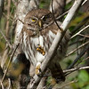 "Ferruginous Pygmy-Owl © 2009 Nova Mackentley Laguna Atascosa NWR, TX FPO  <div class=""ss-paypal-button""><div class=""ss-paypal-add-to-cart-section""><div class=""ss-paypal-product-options""><h4>Mat Sizes</h4><ul><li><a href=""https://www.paypal.com/cgi-bin/webscr?cmd=_cart&amp;business=T77V5VKCW4K2U&amp;lc=US&amp;item_name=Ferruginous%20Pygmy-Owl%20%C2%A9%202009%20Nova%20Mackentley%20Laguna%20Atascosa%20NWR%2C%20TX%20FPO&amp;item_number=http%3A%2F%2Fwww.nightflightimages.com%2FGalleries-1%2FOwls%2Fi-PSBJDQj&amp;button_subtype=products&amp;no_note=0&amp;cn=Add%20special%20instructions%20to%20the%20seller%3A&amp;no_shipping=2&amp;currency_code=USD&amp;weight_unit=lbs&amp;add=1&amp;bn=PP-ShopCartBF%3Abtn_cart_SM.gif%3ANonHosted&amp;on0=Mat%20Sizes&amp;option_select0=5%20x%207&amp;option_amount0=10.00&amp;option_select1=8%20x%2010&amp;option_amount1=18.00&amp;option_select2=11%20x%2014&amp;option_amount2=28.00&amp;option_select3=card&amp;option_amount3=4.00&amp;option_index=0&amp;charset=utf-8&amp;submit=&amp;os0=5%20x%207"" target=""paypal""><span>5 x 7 $11.00 USD</span><img src=""https://www.paypalobjects.com/en_US/i/btn/btn_cart_SM.gif""></a></li><li><a href=""https://www.paypal.com/cgi-bin/webscr?cmd=_cart&amp;business=T77V5VKCW4K2U&amp;lc=US&amp;item_name=Ferruginous%20Pygmy-Owl%20%C2%A9%202009%20Nova%20Mackentley%20Laguna%20Atascosa%20NWR%2C%20TX%20FPO&amp;item_number=http%3A%2F%2Fwww.nightflightimages.com%2FGalleries-1%2FOwls%2Fi-PSBJDQj&amp;button_subtype=products&amp;no_note=0&amp;cn=Add%20special%20instructions%20to%20the%20seller%3A&amp;no_shipping=2&amp;currency_code=USD&amp;weight_unit=lbs&amp;add=1&amp;bn=PP-ShopCartBF%3Abtn_cart_SM.gif%3ANonHosted&amp;on0=Mat%20Sizes&amp;option_select0=5%20x%207&amp;option_amount0=10.00&amp;option_select1=8%20x%2010&amp;option_amount1=18.00&amp;option_select2=11%20x%2014&amp;option_amount2=28.00&amp;option_select3=card&amp;option_amount3=4.00&amp;option_index=0&amp;charset=utf-8&amp;submit=&amp;os0=8%20x%2010"" target=""paypal""><span>8 x 10 $19.00 USD</span><img src=""https://www.paypalobjects.com/en_US/i/btn/btn_cart_SM.gif""></a></li><li><a href=""https://www.paypal.com/cgi-bin/webscr?cmd=_cart&amp;business=T77V5VKCW4K2U&amp;lc=US&amp;item_name=Ferruginous%20Pygmy-Owl%20%C2%A9%202009%20Nova%20Mackentley%20Laguna%20Atascosa%20NWR%2C%20TX%20FPO&amp;item_number=http%3A%2F%2Fwww.nightflightimages.com%2FGalleries-1%2FOwls%2Fi-PSBJDQj&amp;button_subtype=products&amp;no_note=0&amp;cn=Add%20special%20instructions%20to%20the%20seller%3A&amp;no_shipping=2&amp;currency_code=USD&amp;weight_unit=lbs&amp;add=1&amp;bn=PP-ShopCartBF%3Abtn_cart_SM.gif%3ANonHosted&amp;on0=Mat%20Sizes&amp;option_select0=5%20x%207&amp;option_amount0=10.00&amp;option_select1=8%20x%2010&amp;option_amount1=18.00&amp;option_select2=11%20x%2014&amp;option_amount2=28.00&amp;option_select3=card&amp;option_amount3=4.00&amp;option_index=0&amp;charset=utf-8&amp;submit=&amp;os0=11%20x%2014"" target=""paypal""><span>11 x 14 $29.00 USD</span><img src=""https://www.paypalobjects.com/en_US/i/btn/btn_cart_SM.gif""></a></li><li><a href=""https://www.paypal.com/cgi-bin/webscr?cmd=_cart&amp;business=T77V5VKCW4K2U&amp;lc=US&amp;item_name=Ferruginous%20Pygmy-Owl%20%C2%A9%202009%20Nova%20Mackentley%20Laguna%20Atascosa%20NWR%2C%20TX%20FPO&amp;item_number=http%3A%2F%2Fwww.nightflightimages.com%2FGalleries-1%2FOwls%2Fi-PSBJDQj&amp;button_subtype=products&amp;no_note=0&amp;cn=Add%20special%20instructions%20to%20the%20seller%3A&amp;no_shipping=2&amp;currency_code=USD&amp;weight_unit=lbs&amp;add=1&amp;bn=PP-ShopCartBF%3Abtn_cart_SM.gif%3ANonHosted&amp;on0=Mat%20Sizes&amp;option_select0=5%20x%207&amp;option_amount0=10.00&amp;option_select1=8%20x%2010&amp;option_amount1=18.00&amp;option_select2=11%20x%2014&amp;option_amount2=28.00&amp;option_select3=card&amp;option_amount3=4.00&amp;option_index=0&amp;charset=utf-8&amp;submit=&amp;os0=card"" target=""paypal""><span>card $5.00 USD</span><img src=""https://www.paypalobjects.com/en_US/i/btn/btn_cart_SM.gif""></a></li></ul></div></div> <div class=""ss-paypal-view-cart-section""><a href=""https://www.paypal.com/cgi-bin/webscr?cmd=_cart&amp;business=T77V5VKCW4K2U&amp;display=1&amp;item_name=Ferruginous%20Pygmy-Owl%20%C2%A9%202009%20Nova%20Mackentley%20Laguna%20Atascosa%20NWR%2C%20TX%20FPO&amp;item_number=http%3A%2F%2Fwww.nightflightimages.com%2FGalleries-1%2FOwls%2Fi-PSBJDQj&amp;charset=utf-8&amp;submit="" target=""paypal"" class=""ss-paypal-submit-button""><img src=""https://www.paypalobjects.com/en_US/i/btn/btn_viewcart_LG.gif""></a></div></div><div class=""ss-paypal-button-end""></div>"