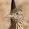"Roadrunner © 2010 Nova Mackentley Big Bend NWR, TX RRF  <div class=""ss-paypal-button""><div class=""ss-paypal-add-to-cart-section""><div class=""ss-paypal-product-options""><h4>Mat Sizes</h4><ul><li><a href=""https://www.paypal.com/cgi-bin/webscr?cmd=_cart&amp;business=T77V5VKCW4K2U&amp;lc=US&amp;item_name=Roadrunner%20%C2%A9%202010%20Nova%20Mackentley%20Big%20Bend%20NWR%2C%20TX%20RRF&amp;item_number=http%3A%2F%2Fwww.nightflightimages.com%2FGalleries-1%2FImpressions%2Fi-QXZDNX4&amp;button_subtype=products&amp;no_note=0&amp;cn=Add%20special%20instructions%20to%20the%20seller%3A&amp;no_shipping=2&amp;currency_code=USD&amp;weight_unit=lbs&amp;add=1&amp;bn=PP-ShopCartBF%3Abtn_cart_SM.gif%3ANonHosted&amp;on0=Mat%20Sizes&amp;option_select0=5%20x%207&amp;option_amount0=10.00&amp;option_select1=8%20x%2010&amp;option_amount1=18.00&amp;option_select2=11%20x%2014&amp;option_amount2=28.00&amp;option_select3=card&amp;option_amount3=4.00&amp;option_index=0&amp;charset=utf-8&amp;submit=&amp;os0=5%20x%207"" target=""paypal""><span>5 x 7 $11.00 USD</span><img src=""https://www.paypalobjects.com/en_US/i/btn/btn_cart_SM.gif""></a></li><li><a href=""https://www.paypal.com/cgi-bin/webscr?cmd=_cart&amp;business=T77V5VKCW4K2U&amp;lc=US&amp;item_name=Roadrunner%20%C2%A9%202010%20Nova%20Mackentley%20Big%20Bend%20NWR%2C%20TX%20RRF&amp;item_number=http%3A%2F%2Fwww.nightflightimages.com%2FGalleries-1%2FImpressions%2Fi-QXZDNX4&amp;button_subtype=products&amp;no_note=0&amp;cn=Add%20special%20instructions%20to%20the%20seller%3A&amp;no_shipping=2&amp;currency_code=USD&amp;weight_unit=lbs&amp;add=1&amp;bn=PP-ShopCartBF%3Abtn_cart_SM.gif%3ANonHosted&amp;on0=Mat%20Sizes&amp;option_select0=5%20x%207&amp;option_amount0=10.00&amp;option_select1=8%20x%2010&amp;option_amount1=18.00&amp;option_select2=11%20x%2014&amp;option_amount2=28.00&amp;option_select3=card&amp;option_amount3=4.00&amp;option_index=0&amp;charset=utf-8&amp;submit=&amp;os0=8%20x%2010"" target=""paypal""><span>8 x 10 $19.00 USD</span><img src=""https://www.paypalobjects.com/en_US/i/btn/btn_cart_SM.gif""></a></li><li><a href=""https://www.paypal.com/cgi-bin/webscr?cmd=_cart&amp;business=T77V5VKCW4K2U&amp;lc=US&amp;item_name=Roadrunner%20%C2%A9%202010%20Nova%20Mackentley%20Big%20Bend%20NWR%2C%20TX%20RRF&amp;item_number=http%3A%2F%2Fwww.nightflightimages.com%2FGalleries-1%2FImpressions%2Fi-QXZDNX4&amp;button_subtype=products&amp;no_note=0&amp;cn=Add%20special%20instructions%20to%20the%20seller%3A&amp;no_shipping=2&amp;currency_code=USD&amp;weight_unit=lbs&amp;add=1&amp;bn=PP-ShopCartBF%3Abtn_cart_SM.gif%3ANonHosted&amp;on0=Mat%20Sizes&amp;option_select0=5%20x%207&amp;option_amount0=10.00&amp;option_select1=8%20x%2010&amp;option_amount1=18.00&amp;option_select2=11%20x%2014&amp;option_amount2=28.00&amp;option_select3=card&amp;option_amount3=4.00&amp;option_index=0&amp;charset=utf-8&amp;submit=&amp;os0=11%20x%2014"" target=""paypal""><span>11 x 14 $29.00 USD</span><img src=""https://www.paypalobjects.com/en_US/i/btn/btn_cart_SM.gif""></a></li><li><a href=""https://www.paypal.com/cgi-bin/webscr?cmd=_cart&amp;business=T77V5VKCW4K2U&amp;lc=US&amp;item_name=Roadrunner%20%C2%A9%202010%20Nova%20Mackentley%20Big%20Bend%20NWR%2C%20TX%20RRF&amp;item_number=http%3A%2F%2Fwww.nightflightimages.com%2FGalleries-1%2FImpressions%2Fi-QXZDNX4&amp;button_subtype=products&amp;no_note=0&amp;cn=Add%20special%20instructions%20to%20the%20seller%3A&amp;no_shipping=2&amp;currency_code=USD&amp;weight_unit=lbs&amp;add=1&amp;bn=PP-ShopCartBF%3Abtn_cart_SM.gif%3ANonHosted&amp;on0=Mat%20Sizes&amp;option_select0=5%20x%207&amp;option_amount0=10.00&amp;option_select1=8%20x%2010&amp;option_amount1=18.00&amp;option_select2=11%20x%2014&amp;option_amount2=28.00&amp;option_select3=card&amp;option_amount3=4.00&amp;option_index=0&amp;charset=utf-8&amp;submit=&amp;os0=card"" target=""paypal""><span>card $5.00 USD</span><img src=""https://www.paypalobjects.com/en_US/i/btn/btn_cart_SM.gif""></a></li></ul></div></div> <div class=""ss-paypal-view-cart-section""><a href=""https://www.paypal.com/cgi-bin/webscr?cmd=_cart&amp;business=T77V5VKCW4K2U&amp;display=1&amp;item_name=Roadrunner%20%C2%A9%202010%20Nova%20Mackentley%20Big%20Bend%20NWR%2C%20TX%20RRF&amp;item_number=http%3A%2F%2Fwww.nightflightimages.com%2FGalleries-1%2FImpressions%2Fi-QXZDNX4&amp;charset=utf-8&amp;submit="" target=""paypal"" class=""ss-paypal-submit-button""><img src=""https://www.paypalobjects.com/en_US/i/btn/btn_viewcart_LG.gif""></a></div></div><div class=""ss-paypal-button-end""></div>"