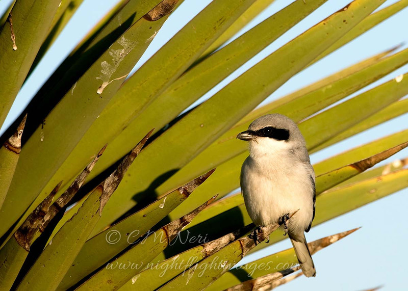 """Loggerhead Shrike © 2009 C. M. Neri.  Laguna Atascosa NWR, TX LOSHTX  <div class=""""ss-paypal-button""""> <div class=""""ss-paypal-add-to-cart-section""""><div class=""""ss-paypal-product-options""""> <h4>Mat Sizes</h4> <ul> <li><a href=""""https://www.paypal.com/cgi-bin/webscr?cmd=_cart&business=T77V5VKCW4K2U&lc=US&item_name=Loggerhead%20Shrike%20%C2%A9%202009%20C.%20M.%20Neri.%20%20Laguna%20Atascosa%20NWR%2C%20TX%20LOSHTX&item_number=http%3A%2F%2Fwww.nightflightimages.com%2FGalleries-1%2FLower-Rio-Grande-Valley-TX%2Fi-Qw69RM7&button_subtype=products&no_note=0&cn=Add%20special%20instructions%20to%20the%20seller%3A&no_shipping=2&currency_code=USD&weight_unit=lbs&add=1&bn=PP-ShopCartBF%3Abtn_cart_SM.gif%3ANonHosted&on0=Mat%20Sizes&option_select0=5%20x%207&option_amount0=10.00&option_select1=8%20x%2010&option_amount1=18.00&option_select2=11%20x%2014&option_amount2=28.00&option_select3=card&option_amount3=4.00&option_index=0&submit=&os0=5%20x%207"""" target=""""paypal""""><span>5 x 7 $10.00 USD</span><img src=""""https://www.paypalobjects.com/en_US/i/btn/btn_cart_SM.gif""""></a></li> <li><a href=""""https://www.paypal.com/cgi-bin/webscr?cmd=_cart&business=T77V5VKCW4K2U&lc=US&item_name=Loggerhead%20Shrike%20%C2%A9%202009%20C.%20M.%20Neri.%20%20Laguna%20Atascosa%20NWR%2C%20TX%20LOSHTX&item_number=http%3A%2F%2Fwww.nightflightimages.com%2FGalleries-1%2FLower-Rio-Grande-Valley-TX%2Fi-Qw69RM7&button_subtype=products&no_note=0&cn=Add%20special%20instructions%20to%20the%20seller%3A&no_shipping=2&currency_code=USD&weight_unit=lbs&add=1&bn=PP-ShopCartBF%3Abtn_cart_SM.gif%3ANonHosted&on0=Mat%20Sizes&option_select0=5%20x%207&option_amount0=10.00&option_select1=8%20x%2010&option_amount1=18.00&option_select2=11%20x%2014&option_amount2=28.00&option_select3=card&option_amount3=4.00&option_index=0&submit=&os0=8%20x%2010"""" target=""""paypal""""><span>8 x 10 $18.00 USD</span><img src=""""https://www.paypalobjects.com/en_US/i/btn/btn_cart_SM.gif""""></a></li> <li><a href=""""https://www.paypal.com/cgi-bin/webscr?cmd=_cart&business=T77V5VKCW4"""