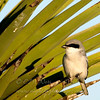 "Loggerhead Shrike © 2009 C. M. Neri.  Laguna Atascosa NWR, TX LOSHTX  <div class=""ss-paypal-button""> <div class=""ss-paypal-add-to-cart-section""><div class=""ss-paypal-product-options""> <h4>Mat Sizes</h4> <ul> <li><a href=""https://www.paypal.com/cgi-bin/webscr?cmd=_cart&amp;business=T77V5VKCW4K2U&amp;lc=US&amp;item_name=Loggerhead%20Shrike%20%C2%A9%202009%20C.%20M.%20Neri.%20%20Laguna%20Atascosa%20NWR%2C%20TX%20LOSHTX&amp;item_number=http%3A%2F%2Fwww.nightflightimages.com%2FGalleries-1%2FLower-Rio-Grande-Valley-TX%2Fi-Qw69RM7&amp;button_subtype=products&amp;no_note=0&amp;cn=Add%20special%20instructions%20to%20the%20seller%3A&amp;no_shipping=2&amp;currency_code=USD&amp;weight_unit=lbs&amp;add=1&amp;bn=PP-ShopCartBF%3Abtn_cart_SM.gif%3ANonHosted&amp;on0=Mat%20Sizes&amp;option_select0=5%20x%207&amp;option_amount0=10.00&amp;option_select1=8%20x%2010&amp;option_amount1=18.00&amp;option_select2=11%20x%2014&amp;option_amount2=28.00&amp;option_select3=card&amp;option_amount3=4.00&amp;option_index=0&amp;submit=&amp;os0=5%20x%207"" target=""paypal""><span>5 x 7 $10.00 USD</span><img src=""https://www.paypalobjects.com/en_US/i/btn/btn_cart_SM.gif""></a></li> <li><a href=""https://www.paypal.com/cgi-bin/webscr?cmd=_cart&amp;business=T77V5VKCW4K2U&amp;lc=US&amp;item_name=Loggerhead%20Shrike%20%C2%A9%202009%20C.%20M.%20Neri.%20%20Laguna%20Atascosa%20NWR%2C%20TX%20LOSHTX&amp;item_number=http%3A%2F%2Fwww.nightflightimages.com%2FGalleries-1%2FLower-Rio-Grande-Valley-TX%2Fi-Qw69RM7&amp;button_subtype=products&amp;no_note=0&amp;cn=Add%20special%20instructions%20to%20the%20seller%3A&amp;no_shipping=2&amp;currency_code=USD&amp;weight_unit=lbs&amp;add=1&amp;bn=PP-ShopCartBF%3Abtn_cart_SM.gif%3ANonHosted&amp;on0=Mat%20Sizes&amp;option_select0=5%20x%207&amp;option_amount0=10.00&amp;option_select1=8%20x%2010&amp;option_amount1=18.00&amp;option_select2=11%20x%2014&amp;option_amount2=28.00&amp;option_select3=card&amp;option_amount3=4.00&amp;option_index=0&amp;submit=&amp;os0=8%20x%2010"" target=""paypal""><span>8 x 10 $18.00 USD</span><img src=""https://www.paypalobjects.com/en_US/i/btn/btn_cart_SM.gif""></a></li> <li><a href=""https://www.paypal.com/cgi-bin/webscr?cmd=_cart&amp;business=T77V5VKCW4K2U&amp;lc=US&amp;item_name=Loggerhead%20Shrike%20%C2%A9%202009%20C.%20M.%20Neri.%20%20Laguna%20Atascosa%20NWR%2C%20TX%20LOSHTX&amp;item_number=http%3A%2F%2Fwww.nightflightimages.com%2FGalleries-1%2FLower-Rio-Grande-Valley-TX%2Fi-Qw69RM7&amp;button_subtype=products&amp;no_note=0&amp;cn=Add%20special%20instructions%20to%20the%20seller%3A&amp;no_shipping=2&amp;currency_code=USD&amp;weight_unit=lbs&amp;add=1&amp;bn=PP-ShopCartBF%3Abtn_cart_SM.gif%3ANonHosted&amp;on0=Mat%20Sizes&amp;option_select0=5%20x%207&amp;option_amount0=10.00&amp;option_select1=8%20x%2010&amp;option_amount1=18.00&amp;option_select2=11%20x%2014&amp;option_amount2=28.00&amp;option_select3=card&amp;option_amount3=4.00&amp;option_index=0&amp;submit=&amp;os0=11%20x%2014"" target=""paypal""><span>11 x 14 $28.00 USD</span><img src=""https://www.paypalobjects.com/en_US/i/btn/btn_cart_SM.gif""></a></li> <li><a href=""https://www.paypal.com/cgi-bin/webscr?cmd=_cart&amp;business=T77V5VKCW4K2U&amp;lc=US&amp;item_name=Loggerhead%20Shrike%20%C2%A9%202009%20C.%20M.%20Neri.%20%20Laguna%20Atascosa%20NWR%2C%20TX%20LOSHTX&amp;item_number=http%3A%2F%2Fwww.nightflightimages.com%2FGalleries-1%2FLower-Rio-Grande-Valley-TX%2Fi-Qw69RM7&amp;button_subtype=products&amp;no_note=0&amp;cn=Add%20special%20instructions%20to%20the%20seller%3A&amp;no_shipping=2&amp;currency_code=USD&amp;weight_unit=lbs&amp;add=1&amp;bn=PP-ShopCartBF%3Abtn_cart_SM.gif%3ANonHosted&amp;on0=Mat%20Sizes&amp;option_select0=5%20x%207&amp;option_amount0=10.00&amp;option_select1=8%20x%2010&amp;option_amount1=18.00&amp;option_select2=11%20x%2014&amp;option_amount2=28.00&amp;option_select3=card&amp;option_amount3=4.00&amp;option_index=0&amp;submit=&amp;os0=card"" target=""paypal""><span>card $4.00 USD</span><img src=""https://www.paypalobjects.com/en_US/i/btn/btn_cart_SM.gif""></a></li> </ul> </div></div> <div class=""ss-paypal-view-cart-section""><a href=""https://www.paypal.com/cgi-bin/webscr?cmd=_cart&amp;business=T77V5VKCW4K2U&amp;display=1&amp;item_name=Loggerhead%20Shrike%20%C2%A9%202009%20C.%20M.%20Neri.%20%20Laguna%20Atascosa%20NWR%2C%20TX%20LOSHTX&amp;item_number=http%3A%2F%2Fwww.nightflightimages.com%2FGalleries-1%2FLower-Rio-Grande-Valley-TX%2Fi-Qw69RM7&amp;submit="" target=""paypal"" class=""ss-paypal-submit-button""><img src=""https://www.paypalobjects.com/en_US/i/btn/btn_viewcart_LG.gif""></a></div> </div><div class=""ss-paypal-button-end"" style=""""></div>"