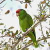 "Red-crowned Parrot © 2009 C. M. Neri.  Harlingen, TX RCPA  <div class=""ss-paypal-button""> <div class=""ss-paypal-add-to-cart-section""><div class=""ss-paypal-product-options""> <h4>Mat Sizes</h4> <ul> <li><a href=""https://www.paypal.com/cgi-bin/webscr?cmd=_cart&business=T77V5VKCW4K2U&lc=US&item_name=Red-crowned%20Parrot%20%C2%A9%202009%20C.%20M.%20Neri.%20%20Harlingen%2C%20TX%20RCPA&item_number=http%3A%2F%2Fwww.nightflightimages.com%2FGalleries-1%2FLower-Rio-Grande-Valley-TX%2Fi-RJ7n7BX&button_subtype=products&no_note=0&cn=Add%20special%20instructions%20to%20the%20seller%3A&no_shipping=2&currency_code=USD&weight_unit=lbs&add=1&bn=PP-ShopCartBF%3Abtn_cart_SM.gif%3ANonHosted&on0=Mat%20Sizes&option_select0=5%20x%207&option_amount0=10.00&option_select1=8%20x%2010&option_amount1=18.00&option_select2=11%20x%2014&option_amount2=28.00&option_select3=card&option_amount3=4.00&option_index=0&submit=&os0=5%20x%207"" target=""paypal""><span>5 x 7 $10.00 USD</span><img src=""https://www.paypalobjects.com/en_US/i/btn/btn_cart_SM.gif""></a></li> <li><a href=""https://www.paypal.com/cgi-bin/webscr?cmd=_cart&business=T77V5VKCW4K2U&lc=US&item_name=Red-crowned%20Parrot%20%C2%A9%202009%20C.%20M.%20Neri.%20%20Harlingen%2C%20TX%20RCPA&item_number=http%3A%2F%2Fwww.nightflightimages.com%2FGalleries-1%2FLower-Rio-Grande-Valley-TX%2Fi-RJ7n7BX&button_subtype=products&no_note=0&cn=Add%20special%20instructions%20to%20the%20seller%3A&no_shipping=2&currency_code=USD&weight_unit=lbs&add=1&bn=PP-ShopCartBF%3Abtn_cart_SM.gif%3ANonHosted&on0=Mat%20Sizes&option_select0=5%20x%207&option_amount0=10.00&option_select1=8%20x%2010&option_amount1=18.00&option_select2=11%20x%2014&option_amount2=28.00&option_select3=card&option_amount3=4.00&option_index=0&submit=&os0=8%20x%2010"" target=""paypal""><span>8 x 10 $18.00 USD</span><img src=""https://www.paypalobjects.com/en_US/i/btn/btn_cart_SM.gif""></a></li> <li><a href=""https://www.paypal.com/cgi-bin/webscr?cmd=_cart&business=T77V5VKCW4K2U&lc=US&item_name=Red-crowned%20Parrot%20%C2%A9%202009%20C.%20M.%20Neri.%20%20Harlingen%2C%20TX%20RCPA&item_number=http%3A%2F%2Fwww.nightflightimages.com%2FGalleries-1%2FLower-Rio-Grande-Valley-TX%2Fi-RJ7n7BX&button_subtype=products&no_note=0&cn=Add%20special%20instructions%20to%20the%20seller%3A&no_shipping=2&currency_code=USD&weight_unit=lbs&add=1&bn=PP-ShopCartBF%3Abtn_cart_SM.gif%3ANonHosted&on0=Mat%20Sizes&option_select0=5%20x%207&option_amount0=10.00&option_select1=8%20x%2010&option_amount1=18.00&option_select2=11%20x%2014&option_amount2=28.00&option_select3=card&option_amount3=4.00&option_index=0&submit=&os0=11%20x%2014"" target=""paypal""><span>11 x 14 $28.00 USD</span><img src=""https://www.paypalobjects.com/en_US/i/btn/btn_cart_SM.gif""></a></li> <li><a href=""https://www.paypal.com/cgi-bin/webscr?cmd=_cart&business=T77V5VKCW4K2U&lc=US&item_name=Red-crowned%20Parrot%20%C2%A9%202009%20C.%20M.%20Neri.%20%20Harlingen%2C%20TX%20RCPA&item_number=http%3A%2F%2Fwww.nightflightimages.com%2FGalleries-1%2FLower-Rio-Grande-Valley-TX%2Fi-RJ7n7BX&button_subtype=products&no_note=0&cn=Add%20special%20instructions%20to%20the%20seller%3A&no_shipping=2&currency_code=USD&weight_unit=lbs&add=1&bn=PP-ShopCartBF%3Abtn_cart_SM.gif%3ANonHosted&on0=Mat%20Sizes&option_select0=5%20x%207&option_amount0=10.00&option_select1=8%20x%2010&option_amount1=18.00&option_select2=11%20x%2014&option_amount2=28.00&option_select3=card&option_amount3=4.00&option_index=0&submit=&os0=card"" target=""paypal""><span>card $4.00 USD</span><img src=""https://www.paypalobjects.com/en_US/i/btn/btn_cart_SM.gif""></a></li> </ul> </div></div> <div class=""ss-paypal-view-cart-section""><a href=""https://www.paypal.com/cgi-bin/webscr?cmd=_cart&business=T77V5VKCW4K2U&display=1&item_name=Red-crowned%20Parrot%20%C2%A9%202009%20C.%20M.%20Neri.%20%20Harlingen%2C%20TX%20RCPA&item_number=http%3A%2F%2Fwww.nightflightimages.com%2FGalleries-1%2FLower-Rio-Grande-Valley-TX%2Fi-RJ7n7BX&submit="" target=""paypal"" class=""ss-paypal-submit-button""><img src=""https://www.paypalobjects.com/en_US/i/btn/btn_viewcart_LG.gif""></a></div> </div><div class=""ss-paypal-button-end"" style=""""></div>"