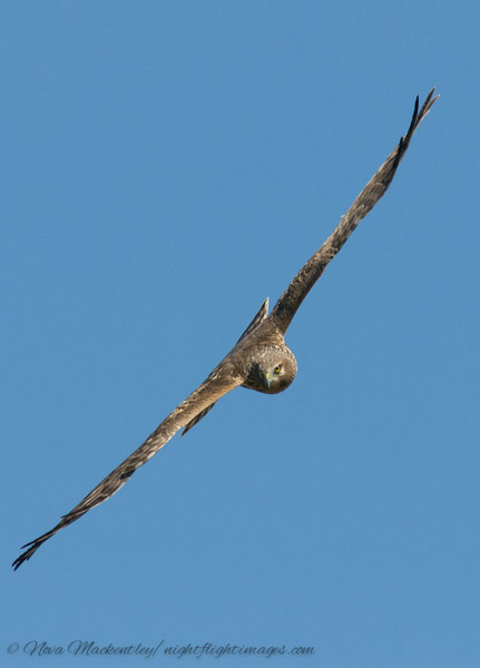 northern harrier 05