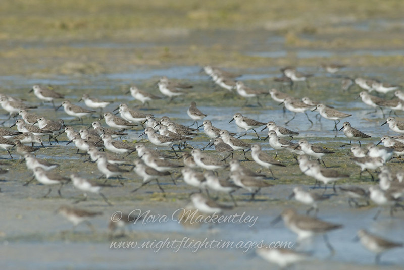 "Shorebirds © 2008 Nova Mackentley Laguna Atascosa NWR, TX SBI  <div class=""ss-paypal-button""><div class=""ss-paypal-add-to-cart-section""><div class=""ss-paypal-product-options""><h4>Mat Sizes</h4><ul><li><a href=""https://www.paypal.com/cgi-bin/webscr?cmd=_cart&amp;business=T77V5VKCW4K2U&amp;lc=US&amp;item_name=Shorebirds%20%C2%A9%202008%20Nova%20Mackentley%20Laguna%20Atascosa%20NWR%2C%20TX%20SBI&amp;item_number=http%3A%2F%2Fwww.nightflightimages.com%2FGalleries-1%2FShore%2Fi-TRwwCcr&amp;button_subtype=products&amp;no_note=0&amp;cn=Add%20special%20instructions%20to%20the%20seller%3A&amp;no_shipping=2&amp;currency_code=USD&amp;weight_unit=lbs&amp;add=1&amp;bn=PP-ShopCartBF%3Abtn_cart_SM.gif%3ANonHosted&amp;on0=Mat%20Sizes&amp;option_select0=5%20x%207&amp;option_amount0=10.00&amp;option_select1=8%20x%2010&amp;option_amount1=18.00&amp;option_select2=11%20x%2014&amp;option_amount2=28.00&amp;option_select3=card&amp;option_amount3=4.00&amp;option_index=0&amp;charset=utf-8&amp;submit=&amp;os0=5%20x%207"" target=""paypal""><span>5 x 7 $11.00 USD</span><img src=""https://www.paypalobjects.com/en_US/i/btn/btn_cart_SM.gif""></a></li><li><a href=""https://www.paypal.com/cgi-bin/webscr?cmd=_cart&amp;business=T77V5VKCW4K2U&amp;lc=US&amp;item_name=Shorebirds%20%C2%A9%202008%20Nova%20Mackentley%20Laguna%20Atascosa%20NWR%2C%20TX%20SBI&amp;item_number=http%3A%2F%2Fwww.nightflightimages.com%2FGalleries-1%2FShore%2Fi-TRwwCcr&amp;button_subtype=products&amp;no_note=0&amp;cn=Add%20special%20instructions%20to%20the%20seller%3A&amp;no_shipping=2&amp;currency_code=USD&amp;weight_unit=lbs&amp;add=1&amp;bn=PP-ShopCartBF%3Abtn_cart_SM.gif%3ANonHosted&amp;on0=Mat%20Sizes&amp;option_select0=5%20x%207&amp;option_amount0=10.00&amp;option_select1=8%20x%2010&amp;option_amount1=18.00&amp;option_select2=11%20x%2014&amp;option_amount2=28.00&amp;option_select3=card&amp;option_amount3=4.00&amp;option_index=0&amp;charset=utf-8&amp;submit=&amp;os0=8%20x%2010"" target=""paypal""><span>8 x 10 $19.00 USD</span><img src=""https://www.paypalobjects.com/en_US/i/btn/btn_cart_SM.gif""></a></li><li><a href=""https://www.paypal.com/cgi-bin/webscr?cmd=_cart&amp;business=T77V5VKCW4K2U&amp;lc=US&amp;item_name=Shorebirds%20%C2%A9%202008%20Nova%20Mackentley%20Laguna%20Atascosa%20NWR%2C%20TX%20SBI&amp;item_number=http%3A%2F%2Fwww.nightflightimages.com%2FGalleries-1%2FShore%2Fi-TRwwCcr&amp;button_subtype=products&amp;no_note=0&amp;cn=Add%20special%20instructions%20to%20the%20seller%3A&amp;no_shipping=2&amp;currency_code=USD&amp;weight_unit=lbs&amp;add=1&amp;bn=PP-ShopCartBF%3Abtn_cart_SM.gif%3ANonHosted&amp;on0=Mat%20Sizes&amp;option_select0=5%20x%207&amp;option_amount0=10.00&amp;option_select1=8%20x%2010&amp;option_amount1=18.00&amp;option_select2=11%20x%2014&amp;option_amount2=28.00&amp;option_select3=card&amp;option_amount3=4.00&amp;option_index=0&amp;charset=utf-8&amp;submit=&amp;os0=11%20x%2014"" target=""paypal""><span>11 x 14 $29.00 USD</span><img src=""https://www.paypalobjects.com/en_US/i/btn/btn_cart_SM.gif""></a></li><li><a href=""https://www.paypal.com/cgi-bin/webscr?cmd=_cart&amp;business=T77V5VKCW4K2U&amp;lc=US&amp;item_name=Shorebirds%20%C2%A9%202008%20Nova%20Mackentley%20Laguna%20Atascosa%20NWR%2C%20TX%20SBI&amp;item_number=http%3A%2F%2Fwww.nightflightimages.com%2FGalleries-1%2FShore%2Fi-TRwwCcr&amp;button_subtype=products&amp;no_note=0&amp;cn=Add%20special%20instructions%20to%20the%20seller%3A&amp;no_shipping=2&amp;currency_code=USD&amp;weight_unit=lbs&amp;add=1&amp;bn=PP-ShopCartBF%3Abtn_cart_SM.gif%3ANonHosted&amp;on0=Mat%20Sizes&amp;option_select0=5%20x%207&amp;option_amount0=10.00&amp;option_select1=8%20x%2010&amp;option_amount1=18.00&amp;option_select2=11%20x%2014&amp;option_amount2=28.00&amp;option_select3=card&amp;option_amount3=4.00&amp;option_index=0&amp;charset=utf-8&amp;submit=&amp;os0=card"" target=""paypal""><span>card $5.00 USD</span><img src=""https://www.paypalobjects.com/en_US/i/btn/btn_cart_SM.gif""></a></li></ul></div></div> <div class=""ss-paypal-view-cart-section""><a href=""https://www.paypal.com/cgi-bin/webscr?cmd=_cart&amp;business=T77V5VKCW4K2U&amp;display=1&amp;item_name=Shorebirds%20%C2%A9%202008%20Nova%20Mackentley%20Laguna%20Atascosa%20NWR%2C%20TX%20SBI&amp;item_number=http%3A%2F%2Fwww.nightflightimages.com%2FGalleries-1%2FShore%2Fi-TRwwCcr&amp;charset=utf-8&amp;submit="" target=""paypal"" class=""ss-paypal-submit-button""><img src=""https://www.paypalobjects.com/en_US/i/btn/btn_viewcart_LG.gif""></a></div></div><div class=""ss-paypal-button-end""></div>"