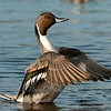 "Northern Pintail © 2009 Nova Mackentley South Padre Island, TX PWO  <div class=""ss-paypal-button""> <div class=""ss-paypal-add-to-cart-section""><div class=""ss-paypal-product-options""> <h4>Mat Sizes</h4> <ul> <li><a href=""https://www.paypal.com/cgi-bin/webscr?cmd=_cart&amp;business=T77V5VKCW4K2U&amp;lc=US&amp;item_name=Northern%20Pintail%20%C2%A9%202009%20Nova%20Mackentley%20South%20Padre%20Island%2C%20TX%20PWO&amp;item_number=http%3A%2F%2Fwww.nightflightimages.com%2FGalleries-1%2FLower-Rio-Grande-Valley-TX%2Fi-TfH99Mv&amp;button_subtype=products&amp;no_note=0&amp;cn=Add%20special%20instructions%20to%20the%20seller%3A&amp;no_shipping=2&amp;currency_code=USD&amp;weight_unit=lbs&amp;add=1&amp;bn=PP-ShopCartBF%3Abtn_cart_SM.gif%3ANonHosted&amp;on0=Mat%20Sizes&amp;option_select0=5%20x%207&amp;option_amount0=10.00&amp;option_select1=8%20x%2010&amp;option_amount1=18.00&amp;option_select2=11%20x%2014&amp;option_amount2=28.00&amp;option_select3=card&amp;option_amount3=4.00&amp;option_index=0&amp;submit=&amp;os0=5%20x%207"" target=""paypal""><span>5 x 7 $10.00 USD</span><img src=""https://www.paypalobjects.com/en_US/i/btn/btn_cart_SM.gif""></a></li> <li><a href=""https://www.paypal.com/cgi-bin/webscr?cmd=_cart&amp;business=T77V5VKCW4K2U&amp;lc=US&amp;item_name=Northern%20Pintail%20%C2%A9%202009%20Nova%20Mackentley%20South%20Padre%20Island%2C%20TX%20PWO&amp;item_number=http%3A%2F%2Fwww.nightflightimages.com%2FGalleries-1%2FLower-Rio-Grande-Valley-TX%2Fi-TfH99Mv&amp;button_subtype=products&amp;no_note=0&amp;cn=Add%20special%20instructions%20to%20the%20seller%3A&amp;no_shipping=2&amp;currency_code=USD&amp;weight_unit=lbs&amp;add=1&amp;bn=PP-ShopCartBF%3Abtn_cart_SM.gif%3ANonHosted&amp;on0=Mat%20Sizes&amp;option_select0=5%20x%207&amp;option_amount0=10.00&amp;option_select1=8%20x%2010&amp;option_amount1=18.00&amp;option_select2=11%20x%2014&amp;option_amount2=28.00&amp;option_select3=card&amp;option_amount3=4.00&amp;option_index=0&amp;submit=&amp;os0=8%20x%2010"" target=""paypal""><span>8 x 10 $18.00 USD</span><img src=""https://www.paypalobjects.com/en_US/i/btn/btn_cart_SM.gif""></a></li> <li><a href=""https://www.paypal.com/cgi-bin/webscr?cmd=_cart&amp;business=T77V5VKCW4K2U&amp;lc=US&amp;item_name=Northern%20Pintail%20%C2%A9%202009%20Nova%20Mackentley%20South%20Padre%20Island%2C%20TX%20PWO&amp;item_number=http%3A%2F%2Fwww.nightflightimages.com%2FGalleries-1%2FLower-Rio-Grande-Valley-TX%2Fi-TfH99Mv&amp;button_subtype=products&amp;no_note=0&amp;cn=Add%20special%20instructions%20to%20the%20seller%3A&amp;no_shipping=2&amp;currency_code=USD&amp;weight_unit=lbs&amp;add=1&amp;bn=PP-ShopCartBF%3Abtn_cart_SM.gif%3ANonHosted&amp;on0=Mat%20Sizes&amp;option_select0=5%20x%207&amp;option_amount0=10.00&amp;option_select1=8%20x%2010&amp;option_amount1=18.00&amp;option_select2=11%20x%2014&amp;option_amount2=28.00&amp;option_select3=card&amp;option_amount3=4.00&amp;option_index=0&amp;submit=&amp;os0=11%20x%2014"" target=""paypal""><span>11 x 14 $28.00 USD</span><img src=""https://www.paypalobjects.com/en_US/i/btn/btn_cart_SM.gif""></a></li> <li><a href=""https://www.paypal.com/cgi-bin/webscr?cmd=_cart&amp;business=T77V5VKCW4K2U&amp;lc=US&amp;item_name=Northern%20Pintail%20%C2%A9%202009%20Nova%20Mackentley%20South%20Padre%20Island%2C%20TX%20PWO&amp;item_number=http%3A%2F%2Fwww.nightflightimages.com%2FGalleries-1%2FLower-Rio-Grande-Valley-TX%2Fi-TfH99Mv&amp;button_subtype=products&amp;no_note=0&amp;cn=Add%20special%20instructions%20to%20the%20seller%3A&amp;no_shipping=2&amp;currency_code=USD&amp;weight_unit=lbs&amp;add=1&amp;bn=PP-ShopCartBF%3Abtn_cart_SM.gif%3ANonHosted&amp;on0=Mat%20Sizes&amp;option_select0=5%20x%207&amp;option_amount0=10.00&amp;option_select1=8%20x%2010&amp;option_amount1=18.00&amp;option_select2=11%20x%2014&amp;option_amount2=28.00&amp;option_select3=card&amp;option_amount3=4.00&amp;option_index=0&amp;submit=&amp;os0=card"" target=""paypal""><span>card $4.00 USD</span><img src=""https://www.paypalobjects.com/en_US/i/btn/btn_cart_SM.gif""></a></li> </ul> </div></div> <div class=""ss-paypal-view-cart-section""><a href=""https://www.paypal.com/cgi-bin/webscr?cmd=_cart&amp;business=T77V5VKCW4K2U&amp;display=1&amp;item_name=Northern%20Pintail%20%C2%A9%202009%20Nova%20Mackentley%20South%20Padre%20Island%2C%20TX%20PWO&amp;item_number=http%3A%2F%2Fwww.nightflightimages.com%2FGalleries-1%2FLower-Rio-Grande-Valley-TX%2Fi-TfH99Mv&amp;submit="" target=""paypal"" class=""ss-paypal-submit-button""><img src=""https://www.paypalobjects.com/en_US/i/btn/btn_viewcart_LG.gif""></a></div> </div><div class=""ss-paypal-button-end"" style=""""></div>"