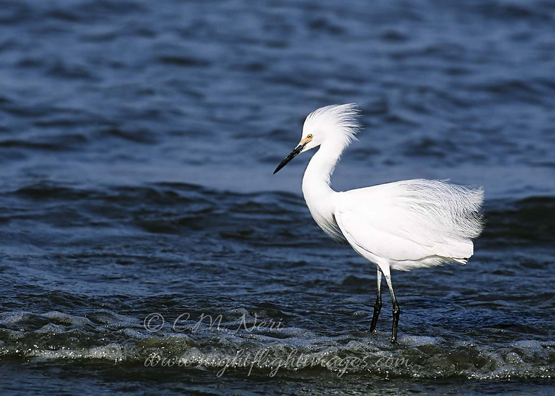 "Snowy Egret © 1997 C. M. Neri.  Deleware Bay, DE SNEG  <div class=""ss-paypal-button""> <div class=""ss-paypal-add-to-cart-section""><div class=""ss-paypal-product-options""> <h4>Mat Sizes</h4> <ul> <li><a href=""https://www.paypal.com/cgi-bin/webscr?cmd=_cart&amp;business=T77V5VKCW4K2U&amp;lc=US&amp;item_name=Snowy%20Egret%20%C2%A9%201997%20C.%20M.%20Neri.%20%20Deleware%20Bay%2C%20DE%20SNEG&amp;item_number=http%3A%2F%2Fwww.nightflightimages.com%2FGalleries-1%2FLower-Rio-Grande-Valley-TX%2Fi-Tv8tkF4&amp;button_subtype=products&amp;no_note=0&amp;cn=Add%20special%20instructions%20to%20the%20seller%3A&amp;no_shipping=2&amp;currency_code=USD&amp;weight_unit=lbs&amp;add=1&amp;bn=PP-ShopCartBF%3Abtn_cart_SM.gif%3ANonHosted&amp;on0=Mat%20Sizes&amp;option_select0=5%20x%207&amp;option_amount0=10.00&amp;option_select1=8%20x%2010&amp;option_amount1=18.00&amp;option_select2=11%20x%2014&amp;option_amount2=28.00&amp;option_select3=card&amp;option_amount3=4.00&amp;option_index=0&amp;submit=&amp;os0=5%20x%207"" target=""paypal""><span>5 x 7 $10.00 USD</span><img src=""https://www.paypalobjects.com/en_US/i/btn/btn_cart_SM.gif""></a></li> <li><a href=""https://www.paypal.com/cgi-bin/webscr?cmd=_cart&amp;business=T77V5VKCW4K2U&amp;lc=US&amp;item_name=Snowy%20Egret%20%C2%A9%201997%20C.%20M.%20Neri.%20%20Deleware%20Bay%2C%20DE%20SNEG&amp;item_number=http%3A%2F%2Fwww.nightflightimages.com%2FGalleries-1%2FLower-Rio-Grande-Valley-TX%2Fi-Tv8tkF4&amp;button_subtype=products&amp;no_note=0&amp;cn=Add%20special%20instructions%20to%20the%20seller%3A&amp;no_shipping=2&amp;currency_code=USD&amp;weight_unit=lbs&amp;add=1&amp;bn=PP-ShopCartBF%3Abtn_cart_SM.gif%3ANonHosted&amp;on0=Mat%20Sizes&amp;option_select0=5%20x%207&amp;option_amount0=10.00&amp;option_select1=8%20x%2010&amp;option_amount1=18.00&amp;option_select2=11%20x%2014&amp;option_amount2=28.00&amp;option_select3=card&amp;option_amount3=4.00&amp;option_index=0&amp;submit=&amp;os0=8%20x%2010"" target=""paypal""><span>8 x 10 $18.00 USD</span><img src=""https://www.paypalobjects.com/en_US/i/btn/btn_cart_SM.gif""></a></li> <li><a href=""https://www.paypal.com/cgi-bin/webscr?cmd=_cart&amp;business=T77V5VKCW4K2U&amp;lc=US&amp;item_name=Snowy%20Egret%20%C2%A9%201997%20C.%20M.%20Neri.%20%20Deleware%20Bay%2C%20DE%20SNEG&amp;item_number=http%3A%2F%2Fwww.nightflightimages.com%2FGalleries-1%2FLower-Rio-Grande-Valley-TX%2Fi-Tv8tkF4&amp;button_subtype=products&amp;no_note=0&amp;cn=Add%20special%20instructions%20to%20the%20seller%3A&amp;no_shipping=2&amp;currency_code=USD&amp;weight_unit=lbs&amp;add=1&amp;bn=PP-ShopCartBF%3Abtn_cart_SM.gif%3ANonHosted&amp;on0=Mat%20Sizes&amp;option_select0=5%20x%207&amp;option_amount0=10.00&amp;option_select1=8%20x%2010&amp;option_amount1=18.00&amp;option_select2=11%20x%2014&amp;option_amount2=28.00&amp;option_select3=card&amp;option_amount3=4.00&amp;option_index=0&amp;submit=&amp;os0=11%20x%2014"" target=""paypal""><span>11 x 14 $28.00 USD</span><img src=""https://www.paypalobjects.com/en_US/i/btn/btn_cart_SM.gif""></a></li> <li><a href=""https://www.paypal.com/cgi-bin/webscr?cmd=_cart&amp;business=T77V5VKCW4K2U&amp;lc=US&amp;item_name=Snowy%20Egret%20%C2%A9%201997%20C.%20M.%20Neri.%20%20Deleware%20Bay%2C%20DE%20SNEG&amp;item_number=http%3A%2F%2Fwww.nightflightimages.com%2FGalleries-1%2FLower-Rio-Grande-Valley-TX%2Fi-Tv8tkF4&amp;button_subtype=products&amp;no_note=0&amp;cn=Add%20special%20instructions%20to%20the%20seller%3A&amp;no_shipping=2&amp;currency_code=USD&amp;weight_unit=lbs&amp;add=1&amp;bn=PP-ShopCartBF%3Abtn_cart_SM.gif%3ANonHosted&amp;on0=Mat%20Sizes&amp;option_select0=5%20x%207&amp;option_amount0=10.00&amp;option_select1=8%20x%2010&amp;option_amount1=18.00&amp;option_select2=11%20x%2014&amp;option_amount2=28.00&amp;option_select3=card&amp;option_amount3=4.00&amp;option_index=0&amp;submit=&amp;os0=card"" target=""paypal""><span>card $4.00 USD</span><img src=""https://www.paypalobjects.com/en_US/i/btn/btn_cart_SM.gif""></a></li> </ul> </div></div> <div class=""ss-paypal-view-cart-section""><a href=""https://www.paypal.com/cgi-bin/webscr?cmd=_cart&amp;business=T77V5VKCW4K2U&amp;display=1&amp;item_name=Snowy%20Egret%20%C2%A9%201997%20C.%20M.%20Neri.%20%20Deleware%20Bay%2C%20DE%20SNEG&amp;item_number=http%3A%2F%2Fwww.nightflightimages.com%2FGalleries-1%2FLower-Rio-Grande-Valley-TX%2Fi-Tv8tkF4&amp;submit="" target=""paypal"" class=""ss-paypal-submit-button""><img src=""https://www.paypalobjects.com/en_US/i/btn/btn_viewcart_LG.gif""></a></div> </div><div class=""ss-paypal-button-end"" style=""""></div>"